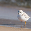 """Piping Plover © 2009 C. M. Neri. Whitefish Point, MI PIPL09  <div class=""""ss-paypal-button""""><div class=""""ss-paypal-add-to-cart-section""""><div class=""""ss-paypal-product-options""""><h4>Mat Sizes</h4><ul><li><a href=""""https://www.paypal.com/cgi-bin/webscr?cmd=_cart&business=T77V5VKCW4K2U&lc=US&item_name=Piping%20Plover%20%C2%A9%202009%20C.%20M.%20Neri.%20Whitefish%20Point%2C%20MI%20PIPL09&item_number=http%3A%2F%2Fwww.nightflightimages.com%2FGalleries-1%2FShore%2Fi-7Tks6f6&button_subtype=products&no_note=0&cn=Add%20special%20instructions%20to%20the%20seller%3A&no_shipping=2&currency_code=USD&weight_unit=lbs&add=1&bn=PP-ShopCartBF%3Abtn_cart_SM.gif%3ANonHosted&on0=Mat%20Sizes&option_select0=5%20x%207&option_amount0=10.00&option_select1=8%20x%2010&option_amount1=18.00&option_select2=11%20x%2014&option_amount2=28.00&option_select3=card&option_amount3=4.00&option_index=0&charset=utf-8&submit=&os0=5%20x%207"""" target=""""paypal""""><span>5 x 7 $11.00 USD</span><img src=""""https://www.paypalobjects.com/en_US/i/btn/btn_cart_SM.gif""""></a></li><li><a href=""""https://www.paypal.com/cgi-bin/webscr?cmd=_cart&business=T77V5VKCW4K2U&lc=US&item_name=Piping%20Plover%20%C2%A9%202009%20C.%20M.%20Neri.%20Whitefish%20Point%2C%20MI%20PIPL09&item_number=http%3A%2F%2Fwww.nightflightimages.com%2FGalleries-1%2FShore%2Fi-7Tks6f6&button_subtype=products&no_note=0&cn=Add%20special%20instructions%20to%20the%20seller%3A&no_shipping=2&currency_code=USD&weight_unit=lbs&add=1&bn=PP-ShopCartBF%3Abtn_cart_SM.gif%3ANonHosted&on0=Mat%20Sizes&option_select0=5%20x%207&option_amount0=10.00&option_select1=8%20x%2010&option_amount1=18.00&option_select2=11%20x%2014&option_amount2=28.00&option_select3=card&option_amount3=4.00&option_index=0&charset=utf-8&submit=&os0=8%20x%2010"""" target=""""paypal""""><span>8 x 10 $19.00 USD</span><img src=""""https://www.paypalobjects.com/en_US/i/btn/btn_cart_SM.gif""""></a></li><li><a href=""""https://www.paypal.com/cgi-bin/webscr?cmd=_cart&business=T77V5VKCW4K2U&lc=US&item_name=Piping%20Plover%20%C2%A9%202009%20C"""