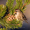 "Common Redpoll © 2009 C. M. Neri.  Whitefish Point, MI CORE  <div class=""ss-paypal-button""><div class=""ss-paypal-add-to-cart-section""><div class=""ss-paypal-product-options""><h4>Mat Sizes</h4><ul><li><a href=""https://www.paypal.com/cgi-bin/webscr?cmd=_cart&business=T77V5VKCW4K2U&lc=US&item_name=Common%20Redpoll%20%C2%A9%202009%20C.%20M.%20Neri.%20%20Whitefish%20Point%2C%20MI%20CORE&item_number=http%3A%2F%2Fwww.nightflightimages.com%2FGalleries-1%2FUpper-Peninsula-of-MI%2Fi-88DZg3N&button_subtype=products&no_note=0&cn=Add%20special%20instructions%20to%20the%20seller%3A&no_shipping=2&currency_code=USD&weight_unit=lbs&add=1&bn=PP-ShopCartBF%3Abtn_cart_SM.gif%3ANonHosted&on0=Mat%20Sizes&option_select0=5%20x%207&option_amount0=10.00&option_select1=8%20x%2010&option_amount1=18.00&option_select2=11%20x%2014&option_amount2=28.00&option_select3=card&option_amount3=4.00&option_index=0&charset=utf-8&submit=&os0=5%20x%207"" target=""paypal""><span>5 x 7 $11.00 USD</span><img src=""https://www.paypalobjects.com/en_US/i/btn/btn_cart_SM.gif""></a></li><li><a href=""https://www.paypal.com/cgi-bin/webscr?cmd=_cart&business=T77V5VKCW4K2U&lc=US&item_name=Common%20Redpoll%20%C2%A9%202009%20C.%20M.%20Neri.%20%20Whitefish%20Point%2C%20MI%20CORE&item_number=http%3A%2F%2Fwww.nightflightimages.com%2FGalleries-1%2FUpper-Peninsula-of-MI%2Fi-88DZg3N&button_subtype=products&no_note=0&cn=Add%20special%20instructions%20to%20the%20seller%3A&no_shipping=2&currency_code=USD&weight_unit=lbs&add=1&bn=PP-ShopCartBF%3Abtn_cart_SM.gif%3ANonHosted&on0=Mat%20Sizes&option_select0=5%20x%207&option_amount0=10.00&option_select1=8%20x%2010&option_amount1=18.00&option_select2=11%20x%2014&option_amount2=28.00&option_select3=card&option_amount3=4.00&option_index=0&charset=utf-8&submit=&os0=8%20x%2010"" target=""paypal""><span>8 x 10 $19.00 USD</span><img src=""https://www.paypalobjects.com/en_US/i/btn/btn_cart_SM.gif""></a></li><li><a href=""https://www.paypal.com/cgi-bin/webscr?cmd=_cart&business=T77V5VKCW4K2U&lc=US&item_name=Common%20Redpoll%20%C2%A9%202009%20C.%20M.%20Neri.%20%20Whitefish%20Point%2C%20MI%20CORE&item_number=http%3A%2F%2Fwww.nightflightimages.com%2FGalleries-1%2FUpper-Peninsula-of-MI%2Fi-88DZg3N&button_subtype=products&no_note=0&cn=Add%20special%20instructions%20to%20the%20seller%3A&no_shipping=2&currency_code=USD&weight_unit=lbs&add=1&bn=PP-ShopCartBF%3Abtn_cart_SM.gif%3ANonHosted&on0=Mat%20Sizes&option_select0=5%20x%207&option_amount0=10.00&option_select1=8%20x%2010&option_amount1=18.00&option_select2=11%20x%2014&option_amount2=28.00&option_select3=card&option_amount3=4.00&option_index=0&charset=utf-8&submit=&os0=11%20x%2014"" target=""paypal""><span>11 x 14 $29.00 USD</span><img src=""https://www.paypalobjects.com/en_US/i/btn/btn_cart_SM.gif""></a></li><li><a href=""https://www.paypal.com/cgi-bin/webscr?cmd=_cart&business=T77V5VKCW4K2U&lc=US&item_name=Common%20Redpoll%20%C2%A9%202009%20C.%20M.%20Neri.%20%20Whitefish%20Point%2C%20MI%20CORE&item_number=http%3A%2F%2Fwww.nightflightimages.com%2FGalleries-1%2FUpper-Peninsula-of-MI%2Fi-88DZg3N&button_subtype=products&no_note=0&cn=Add%20special%20instructions%20to%20the%20seller%3A&no_shipping=2&currency_code=USD&weight_unit=lbs&add=1&bn=PP-ShopCartBF%3Abtn_cart_SM.gif%3ANonHosted&on0=Mat%20Sizes&option_select0=5%20x%207&option_amount0=10.00&option_select1=8%20x%2010&option_amount1=18.00&option_select2=11%20x%2014&option_amount2=28.00&option_select3=card&option_amount3=4.00&option_index=0&charset=utf-8&submit=&os0=card"" target=""paypal""><span>card $5.00 USD</span><img src=""https://www.paypalobjects.com/en_US/i/btn/btn_cart_SM.gif""></a></li></ul></div></div> <div class=""ss-paypal-view-cart-section""><a href=""https://www.paypal.com/cgi-bin/webscr?cmd=_cart&business=T77V5VKCW4K2U&display=1&item_name=Common%20Redpoll%20%C2%A9%202009%20C.%20M.%20Neri.%20%20Whitefish%20Point%2C%20MI%20CORE&item_number=http%3A%2F%2Fwww.nightflightimages.com%2FGalleries-1%2FUpper-Peninsula-of-MI%2Fi-88DZg3N&charset=utf-8&submit="" target=""paypal"" class=""ss-paypal-submit-button""><img src=""https://www.paypalobjects.com/en_US/i/btn/btn_viewcart_LG.gif""></a></div></div><div class=""ss-paypal-button-end""></div>"