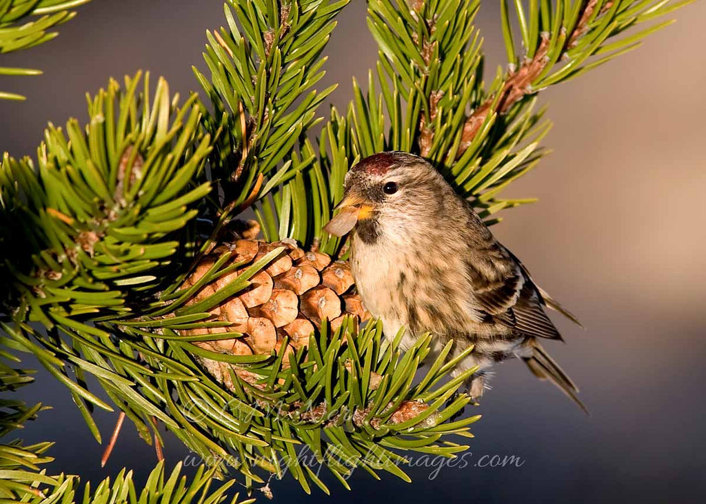 """Common Redpoll © 2009 C. M. Neri.  Whitefish Point, MI CORE  <div class=""""ss-paypal-button""""><div class=""""ss-paypal-add-to-cart-section""""><div class=""""ss-paypal-product-options""""><h4>Mat Sizes</h4><ul><li><a href=""""https://www.paypal.com/cgi-bin/webscr?cmd=_cart&business=T77V5VKCW4K2U&lc=US&item_name=Common%20Redpoll%20%C2%A9%202009%20C.%20M.%20Neri.%20%20Whitefish%20Point%2C%20MI%20CORE&item_number=http%3A%2F%2Fwww.nightflightimages.com%2FGalleries-1%2FUpper-Peninsula-of-MI%2Fi-88DZg3N&button_subtype=products&no_note=0&cn=Add%20special%20instructions%20to%20the%20seller%3A&no_shipping=2&currency_code=USD&weight_unit=lbs&add=1&bn=PP-ShopCartBF%3Abtn_cart_SM.gif%3ANonHosted&on0=Mat%20Sizes&option_select0=5%20x%207&option_amount0=10.00&option_select1=8%20x%2010&option_amount1=18.00&option_select2=11%20x%2014&option_amount2=28.00&option_select3=card&option_amount3=4.00&option_index=0&charset=utf-8&submit=&os0=5%20x%207"""" target=""""paypal""""><span>5 x 7 $11.00 USD</span><img src=""""https://www.paypalobjects.com/en_US/i/btn/btn_cart_SM.gif""""></a></li><li><a href=""""https://www.paypal.com/cgi-bin/webscr?cmd=_cart&business=T77V5VKCW4K2U&lc=US&item_name=Common%20Redpoll%20%C2%A9%202009%20C.%20M.%20Neri.%20%20Whitefish%20Point%2C%20MI%20CORE&item_number=http%3A%2F%2Fwww.nightflightimages.com%2FGalleries-1%2FUpper-Peninsula-of-MI%2Fi-88DZg3N&button_subtype=products&no_note=0&cn=Add%20special%20instructions%20to%20the%20seller%3A&no_shipping=2&currency_code=USD&weight_unit=lbs&add=1&bn=PP-ShopCartBF%3Abtn_cart_SM.gif%3ANonHosted&on0=Mat%20Sizes&option_select0=5%20x%207&option_amount0=10.00&option_select1=8%20x%2010&option_amount1=18.00&option_select2=11%20x%2014&option_amount2=28.00&option_select3=card&option_amount3=4.00&option_index=0&charset=utf-8&submit=&os0=8%20x%2010"""" target=""""paypal""""><span>8 x 10 $19.00 USD</span><img src=""""https://www.paypalobjects.com/en_US/i/btn/btn_cart_SM.gif""""></a></li><li><a href=""""https://www.paypal.com/cgi-bin/webscr?cmd=_cart&business=T77V5VKCW4K2U&lc=US&item_name"""