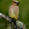 "Cedar Waxwing © 2008 C. M. Neri  Whitefish Point, MI CEDW  <div class=""ss-paypal-button""><div class=""ss-paypal-add-to-cart-section""><div class=""ss-paypal-product-options""><h4>Mat Sizes</h4><ul><li><a href=""https://www.paypal.com/cgi-bin/webscr?cmd=_cart&business=T77V5VKCW4K2U&lc=US&item_name=Cedar%20Waxwing%20%C2%A9%202008%20C.%20M.%20Neri%20%20Whitefish%20Point%2C%20MI%20CEDW&item_number=http%3A%2F%2Fwww.nightflightimages.com%2FGalleries-1%2FUpper-Peninsula-of-MI%2Fi-B8B9LXD&button_subtype=products&no_note=0&cn=Add%20special%20instructions%20to%20the%20seller%3A&no_shipping=2&currency_code=USD&weight_unit=lbs&add=1&bn=PP-ShopCartBF%3Abtn_cart_SM.gif%3ANonHosted&on0=Mat%20Sizes&option_select0=5%20x%207&option_amount0=10.00&option_select1=8%20x%2010&option_amount1=18.00&option_select2=11%20x%2014&option_amount2=28.00&option_select3=card&option_amount3=4.00&option_index=0&charset=utf-8&submit=&os0=5%20x%207"" target=""paypal""><span>5 x 7 $11.00 USD</span><img src=""https://www.paypalobjects.com/en_US/i/btn/btn_cart_SM.gif""></a></li><li><a href=""https://www.paypal.com/cgi-bin/webscr?cmd=_cart&business=T77V5VKCW4K2U&lc=US&item_name=Cedar%20Waxwing%20%C2%A9%202008%20C.%20M.%20Neri%20%20Whitefish%20Point%2C%20MI%20CEDW&item_number=http%3A%2F%2Fwww.nightflightimages.com%2FGalleries-1%2FUpper-Peninsula-of-MI%2Fi-B8B9LXD&button_subtype=products&no_note=0&cn=Add%20special%20instructions%20to%20the%20seller%3A&no_shipping=2&currency_code=USD&weight_unit=lbs&add=1&bn=PP-ShopCartBF%3Abtn_cart_SM.gif%3ANonHosted&on0=Mat%20Sizes&option_select0=5%20x%207&option_amount0=10.00&option_select1=8%20x%2010&option_amount1=18.00&option_select2=11%20x%2014&option_amount2=28.00&option_select3=card&option_amount3=4.00&option_index=0&charset=utf-8&submit=&os0=8%20x%2010"" target=""paypal""><span>8 x 10 $19.00 USD</span><img src=""https://www.paypalobjects.com/en_US/i/btn/btn_cart_SM.gif""></a></li><li><a href=""https://www.paypal.com/cgi-bin/webscr?cmd=_cart&business=T77V5VKCW4K2U&lc=US&item_name=Cedar%20Waxwing%20%C2%A9%202008%20C.%20M.%20Neri%20%20Whitefish%20Point%2C%20MI%20CEDW&item_number=http%3A%2F%2Fwww.nightflightimages.com%2FGalleries-1%2FUpper-Peninsula-of-MI%2Fi-B8B9LXD&button_subtype=products&no_note=0&cn=Add%20special%20instructions%20to%20the%20seller%3A&no_shipping=2&currency_code=USD&weight_unit=lbs&add=1&bn=PP-ShopCartBF%3Abtn_cart_SM.gif%3ANonHosted&on0=Mat%20Sizes&option_select0=5%20x%207&option_amount0=10.00&option_select1=8%20x%2010&option_amount1=18.00&option_select2=11%20x%2014&option_amount2=28.00&option_select3=card&option_amount3=4.00&option_index=0&charset=utf-8&submit=&os0=11%20x%2014"" target=""paypal""><span>11 x 14 $29.00 USD</span><img src=""https://www.paypalobjects.com/en_US/i/btn/btn_cart_SM.gif""></a></li><li><a href=""https://www.paypal.com/cgi-bin/webscr?cmd=_cart&business=T77V5VKCW4K2U&lc=US&item_name=Cedar%20Waxwing%20%C2%A9%202008%20C.%20M.%20Neri%20%20Whitefish%20Point%2C%20MI%20CEDW&item_number=http%3A%2F%2Fwww.nightflightimages.com%2FGalleries-1%2FUpper-Peninsula-of-MI%2Fi-B8B9LXD&button_subtype=products&no_note=0&cn=Add%20special%20instructions%20to%20the%20seller%3A&no_shipping=2&currency_code=USD&weight_unit=lbs&add=1&bn=PP-ShopCartBF%3Abtn_cart_SM.gif%3ANonHosted&on0=Mat%20Sizes&option_select0=5%20x%207&option_amount0=10.00&option_select1=8%20x%2010&option_amount1=18.00&option_select2=11%20x%2014&option_amount2=28.00&option_select3=card&option_amount3=4.00&option_index=0&charset=utf-8&submit=&os0=card"" target=""paypal""><span>card $5.00 USD</span><img src=""https://www.paypalobjects.com/en_US/i/btn/btn_cart_SM.gif""></a></li></ul></div></div> <div class=""ss-paypal-view-cart-section""><a href=""https://www.paypal.com/cgi-bin/webscr?cmd=_cart&business=T77V5VKCW4K2U&display=1&item_name=Cedar%20Waxwing%20%C2%A9%202008%20C.%20M.%20Neri%20%20Whitefish%20Point%2C%20MI%20CEDW&item_number=http%3A%2F%2Fwww.nightflightimages.com%2FGalleries-1%2FUpper-Peninsula-of-MI%2Fi-B8B9LXD&charset=utf-8&submit="" target=""paypal"" class=""ss-paypal-submit-button""><img src=""https://www.paypalobjects.com/en_US/i/btn/btn_viewcart_LG.gif""></a></div></div><div class=""ss-paypal-button-end""></div>"