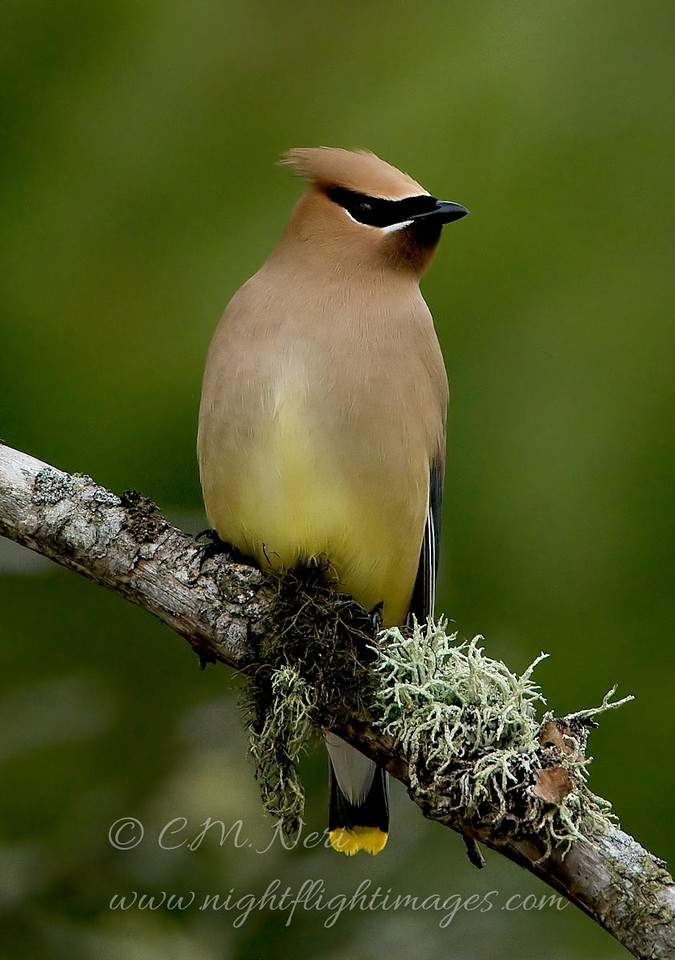 """Cedar Waxwing © 2008 C. M. Neri  Whitefish Point, MI CEDW  <div class=""""ss-paypal-button""""><div class=""""ss-paypal-add-to-cart-section""""><div class=""""ss-paypal-product-options""""><h4>Mat Sizes</h4><ul><li><a href=""""https://www.paypal.com/cgi-bin/webscr?cmd=_cart&business=T77V5VKCW4K2U&lc=US&item_name=Cedar%20Waxwing%20%C2%A9%202008%20C.%20M.%20Neri%20%20Whitefish%20Point%2C%20MI%20CEDW&item_number=http%3A%2F%2Fwww.nightflightimages.com%2FGalleries-1%2FUpper-Peninsula-of-MI%2Fi-B8B9LXD&button_subtype=products&no_note=0&cn=Add%20special%20instructions%20to%20the%20seller%3A&no_shipping=2&currency_code=USD&weight_unit=lbs&add=1&bn=PP-ShopCartBF%3Abtn_cart_SM.gif%3ANonHosted&on0=Mat%20Sizes&option_select0=5%20x%207&option_amount0=10.00&option_select1=8%20x%2010&option_amount1=18.00&option_select2=11%20x%2014&option_amount2=28.00&option_select3=card&option_amount3=4.00&option_index=0&charset=utf-8&submit=&os0=5%20x%207"""" target=""""paypal""""><span>5 x 7 $11.00 USD</span><img src=""""https://www.paypalobjects.com/en_US/i/btn/btn_cart_SM.gif""""></a></li><li><a href=""""https://www.paypal.com/cgi-bin/webscr?cmd=_cart&business=T77V5VKCW4K2U&lc=US&item_name=Cedar%20Waxwing%20%C2%A9%202008%20C.%20M.%20Neri%20%20Whitefish%20Point%2C%20MI%20CEDW&item_number=http%3A%2F%2Fwww.nightflightimages.com%2FGalleries-1%2FUpper-Peninsula-of-MI%2Fi-B8B9LXD&button_subtype=products&no_note=0&cn=Add%20special%20instructions%20to%20the%20seller%3A&no_shipping=2&currency_code=USD&weight_unit=lbs&add=1&bn=PP-ShopCartBF%3Abtn_cart_SM.gif%3ANonHosted&on0=Mat%20Sizes&option_select0=5%20x%207&option_amount0=10.00&option_select1=8%20x%2010&option_amount1=18.00&option_select2=11%20x%2014&option_amount2=28.00&option_select3=card&option_amount3=4.00&option_index=0&charset=utf-8&submit=&os0=8%20x%2010"""" target=""""paypal""""><span>8 x 10 $19.00 USD</span><img src=""""https://www.paypalobjects.com/en_US/i/btn/btn_cart_SM.gif""""></a></li><li><a href=""""https://www.paypal.com/cgi-bin/webscr?cmd=_cart&business=T77V5VKCW4K2U&lc=US&item_name=Cedar"""