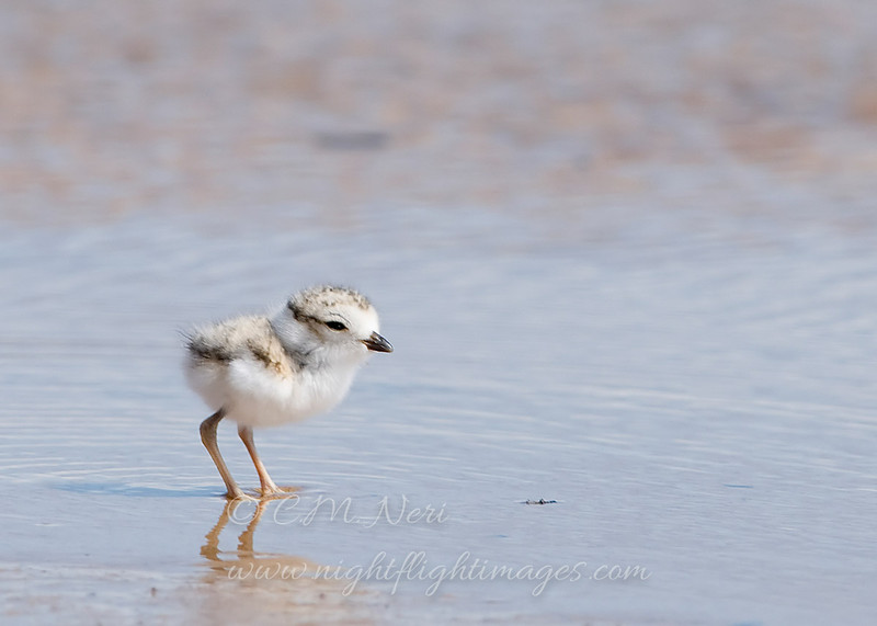 """Piping Plover chick © 2009 C. M. Neri.  Whitefish Point, MI PIPLW  <div class=""""ss-paypal-button""""><div class=""""ss-paypal-add-to-cart-section""""><div class=""""ss-paypal-product-options""""><h4>Mat Sizes</h4><ul><li><a href=""""https://www.paypal.com/cgi-bin/webscr?cmd=_cart&amp;business=T77V5VKCW4K2U&amp;lc=US&amp;item_name=Piping%20Plover%20chick%20%C2%A9%202009%20C.%20M.%20Neri.%20%20Whitefish%20Point%2C%20MI%20PIPLW&amp;item_number=http%3A%2F%2Fwww.nightflightimages.com%2FGalleries-1%2FShore%2Fi-BsCTx8q&amp;button_subtype=products&amp;no_note=0&amp;cn=Add%20special%20instructions%20to%20the%20seller%3A&amp;no_shipping=2&amp;currency_code=USD&amp;weight_unit=lbs&amp;add=1&amp;bn=PP-ShopCartBF%3Abtn_cart_SM.gif%3ANonHosted&amp;on0=Mat%20Sizes&amp;option_select0=5%20x%207&amp;option_amount0=10.00&amp;option_select1=8%20x%2010&amp;option_amount1=18.00&amp;option_select2=11%20x%2014&amp;option_amount2=28.00&amp;option_select3=card&amp;option_amount3=4.00&amp;option_index=0&amp;charset=utf-8&amp;submit=&amp;os0=5%20x%207"""" target=""""paypal""""><span>5 x 7 $11.00 USD</span><img src=""""https://www.paypalobjects.com/en_US/i/btn/btn_cart_SM.gif""""></a></li><li><a href=""""https://www.paypal.com/cgi-bin/webscr?cmd=_cart&amp;business=T77V5VKCW4K2U&amp;lc=US&amp;item_name=Piping%20Plover%20chick%20%C2%A9%202009%20C.%20M.%20Neri.%20%20Whitefish%20Point%2C%20MI%20PIPLW&amp;item_number=http%3A%2F%2Fwww.nightflightimages.com%2FGalleries-1%2FShore%2Fi-BsCTx8q&amp;button_subtype=products&amp;no_note=0&amp;cn=Add%20special%20instructions%20to%20the%20seller%3A&amp;no_shipping=2&amp;currency_code=USD&amp;weight_unit=lbs&amp;add=1&amp;bn=PP-ShopCartBF%3Abtn_cart_SM.gif%3ANonHosted&amp;on0=Mat%20Sizes&amp;option_select0=5%20x%207&amp;option_amount0=10.00&amp;option_select1=8%20x%2010&amp;option_amount1=18.00&amp;option_select2=11%20x%2014&amp;option_amount2=28.00&amp;option_select3=card&amp;option_amount3=4.00&amp;option_index=0&amp;charset=utf-8&amp;submit=&amp;os0=8%20x%2010"""" target=""""paypal""""><span>8 x 10 $19."""