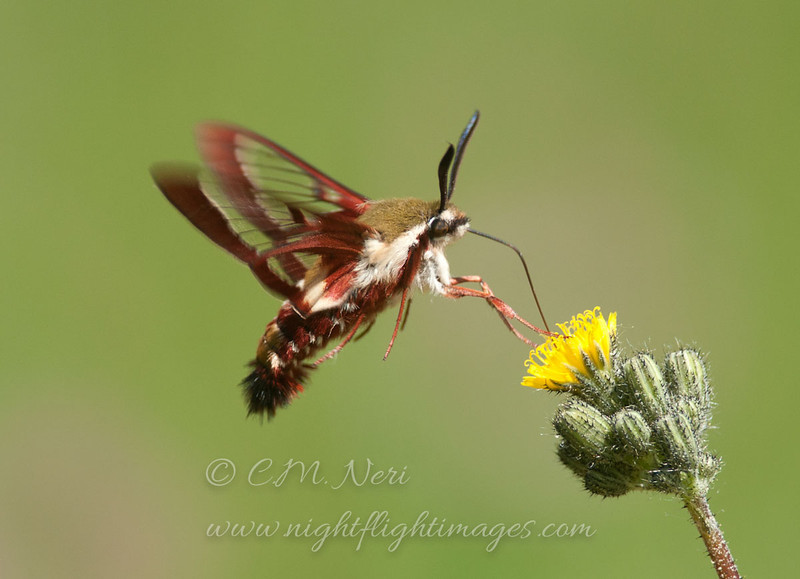 """Clear-winged Sphinx Moth  © 2013 C. M. Neri Whitefish Point, MI CWSPH  <div class=""""ss-paypal-button""""><div class=""""ss-paypal-add-to-cart-section""""><div class=""""ss-paypal-product-options""""><h4>Mat Sizes</h4><ul><li><a href=""""https://www.paypal.com/cgi-bin/webscr?cmd=_cart&business=T77V5VKCW4K2U&lc=US&item_name=Clear-winged%20Sphinx%20Moth%20%20%C2%A9%202013%20C.%20M.%20Neri%20Whitefish%20Point%2C%20MI%20CWSPH&item_number=http%3A%2F%2Fwww.nightflightimages.com%2FGalleries-1%2FButterflies%2Fi-CB9Zbzt&button_subtype=products&no_note=0&cn=Add%20special%20instructions%20to%20the%20seller%3A&no_shipping=2&currency_code=USD&weight_unit=lbs&add=1&bn=PP-ShopCartBF%3Abtn_cart_SM.gif%3ANonHosted&on0=Mat%20Sizes&option_select0=5%20x%207&option_amount0=10.00&option_select1=8%20x%2010&option_amount1=18.00&option_select2=11%20x%2014&option_amount2=28.00&option_select3=card&option_amount3=4.00&option_index=0&charset=utf-8&submit=&os0=5%20x%207"""" target=""""paypal""""><span>5 x 7 $11.00 USD</span><img src=""""https://www.paypalobjects.com/en_US/i/btn/btn_cart_SM.gif""""></a></li><li><a href=""""https://www.paypal.com/cgi-bin/webscr?cmd=_cart&business=T77V5VKCW4K2U&lc=US&item_name=Clear-winged%20Sphinx%20Moth%20%20%C2%A9%202013%20C.%20M.%20Neri%20Whitefish%20Point%2C%20MI%20CWSPH&item_number=http%3A%2F%2Fwww.nightflightimages.com%2FGalleries-1%2FButterflies%2Fi-CB9Zbzt&button_subtype=products&no_note=0&cn=Add%20special%20instructions%20to%20the%20seller%3A&no_shipping=2&currency_code=USD&weight_unit=lbs&add=1&bn=PP-ShopCartBF%3Abtn_cart_SM.gif%3ANonHosted&on0=Mat%20Sizes&option_select0=5%20x%207&option_amount0=10.00&option_select1=8%20x%2010&option_amount1=18.00&option_select2=11%20x%2014&option_amount2=28.00&option_select3=card&option_amount3=4.00&option_index=0&charset=utf-8&submit=&os0=8%20x%2010"""" target=""""paypal""""><span>8 x 10 $19.00 USD</span><img src=""""https://www.paypalobjects.com/en_US/i/btn/btn_cart_SM.gif""""></a></li><li><a href=""""https://www.paypal.com/cgi-bin/webscr?cmd=_cart&business=T77V5VKCW4K2U&l"""