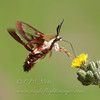 "Clear-winged Sphinx Moth  © 2013 C. M. Neri Whitefish Point, MI CWSPH  <div class=""ss-paypal-button""><div class=""ss-paypal-add-to-cart-section""><div class=""ss-paypal-product-options""><h4>Mat Sizes</h4><ul><li><a href=""https://www.paypal.com/cgi-bin/webscr?cmd=_cart&business=T77V5VKCW4K2U&lc=US&item_name=Clear-winged%20Sphinx%20Moth%20%20%C2%A9%202013%20C.%20M.%20Neri%20Whitefish%20Point%2C%20MI%20CWSPH&item_number=http%3A%2F%2Fwww.nightflightimages.com%2FGalleries-1%2FButterflies%2Fi-CB9Zbzt&button_subtype=products&no_note=0&cn=Add%20special%20instructions%20to%20the%20seller%3A&no_shipping=2&currency_code=USD&weight_unit=lbs&add=1&bn=PP-ShopCartBF%3Abtn_cart_SM.gif%3ANonHosted&on0=Mat%20Sizes&option_select0=5%20x%207&option_amount0=10.00&option_select1=8%20x%2010&option_amount1=18.00&option_select2=11%20x%2014&option_amount2=28.00&option_select3=card&option_amount3=4.00&option_index=0&charset=utf-8&submit=&os0=5%20x%207"" target=""paypal""><span>5 x 7 $11.00 USD</span><img src=""https://www.paypalobjects.com/en_US/i/btn/btn_cart_SM.gif""></a></li><li><a href=""https://www.paypal.com/cgi-bin/webscr?cmd=_cart&business=T77V5VKCW4K2U&lc=US&item_name=Clear-winged%20Sphinx%20Moth%20%20%C2%A9%202013%20C.%20M.%20Neri%20Whitefish%20Point%2C%20MI%20CWSPH&item_number=http%3A%2F%2Fwww.nightflightimages.com%2FGalleries-1%2FButterflies%2Fi-CB9Zbzt&button_subtype=products&no_note=0&cn=Add%20special%20instructions%20to%20the%20seller%3A&no_shipping=2&currency_code=USD&weight_unit=lbs&add=1&bn=PP-ShopCartBF%3Abtn_cart_SM.gif%3ANonHosted&on0=Mat%20Sizes&option_select0=5%20x%207&option_amount0=10.00&option_select1=8%20x%2010&option_amount1=18.00&option_select2=11%20x%2014&option_amount2=28.00&option_select3=card&option_amount3=4.00&option_index=0&charset=utf-8&submit=&os0=8%20x%2010"" target=""paypal""><span>8 x 10 $19.00 USD</span><img src=""https://www.paypalobjects.com/en_US/i/btn/btn_cart_SM.gif""></a></li><li><a href=""https://www.paypal.com/cgi-bin/webscr?cmd=_cart&business=T77V5VKCW4K2U&lc=US&item_name=Clear-winged%20Sphinx%20Moth%20%20%C2%A9%202013%20C.%20M.%20Neri%20Whitefish%20Point%2C%20MI%20CWSPH&item_number=http%3A%2F%2Fwww.nightflightimages.com%2FGalleries-1%2FButterflies%2Fi-CB9Zbzt&button_subtype=products&no_note=0&cn=Add%20special%20instructions%20to%20the%20seller%3A&no_shipping=2&currency_code=USD&weight_unit=lbs&add=1&bn=PP-ShopCartBF%3Abtn_cart_SM.gif%3ANonHosted&on0=Mat%20Sizes&option_select0=5%20x%207&option_amount0=10.00&option_select1=8%20x%2010&option_amount1=18.00&option_select2=11%20x%2014&option_amount2=28.00&option_select3=card&option_amount3=4.00&option_index=0&charset=utf-8&submit=&os0=11%20x%2014"" target=""paypal""><span>11 x 14 $29.00 USD</span><img src=""https://www.paypalobjects.com/en_US/i/btn/btn_cart_SM.gif""></a></li><li><a href=""https://www.paypal.com/cgi-bin/webscr?cmd=_cart&business=T77V5VKCW4K2U&lc=US&item_name=Clear-winged%20Sphinx%20Moth%20%20%C2%A9%202013%20C.%20M.%20Neri%20Whitefish%20Point%2C%20MI%20CWSPH&item_number=http%3A%2F%2Fwww.nightflightimages.com%2FGalleries-1%2FButterflies%2Fi-CB9Zbzt&button_subtype=products&no_note=0&cn=Add%20special%20instructions%20to%20the%20seller%3A&no_shipping=2&currency_code=USD&weight_unit=lbs&add=1&bn=PP-ShopCartBF%3Abtn_cart_SM.gif%3ANonHosted&on0=Mat%20Sizes&option_select0=5%20x%207&option_amount0=10.00&option_select1=8%20x%2010&option_amount1=18.00&option_select2=11%20x%2014&option_amount2=28.00&option_select3=card&option_amount3=4.00&option_index=0&charset=utf-8&submit=&os0=card"" target=""paypal""><span>card $5.00 USD</span><img src=""https://www.paypalobjects.com/en_US/i/btn/btn_cart_SM.gif""></a></li></ul></div></div> <div class=""ss-paypal-view-cart-section""><a href=""https://www.paypal.com/cgi-bin/webscr?cmd=_cart&business=T77V5VKCW4K2U&display=1&item_name=Clear-winged%20Sphinx%20Moth%20%20%C2%A9%202013%20C.%20M.%20Neri%20Whitefish%20Point%2C%20MI%20CWSPH&item_number=http%3A%2F%2Fwww.nightflightimages.com%2FGalleries-1%2FButterflies%2Fi-CB9Zbzt&charset=utf-8&submit="" target=""paypal"" class=""ss-paypal-submit-button""><img src=""https://www.paypalobjects.com/en_US/i/btn/btn_viewcart_LG.gif""></a></div></div><div class=""ss-paypal-button-end""></div>"
