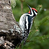"Yellow-bellied Sapsucker © 2009 C. M. Neri. Chippewa County, MI YBSA  <div class=""ss-paypal-button""><div class=""ss-paypal-add-to-cart-section""><div class=""ss-paypal-product-options""><h4>Mat Sizes</h4><ul><li><a href=""https://www.paypal.com/cgi-bin/webscr?cmd=_cart&business=T77V5VKCW4K2U&lc=US&item_name=Yellow-bellied%20Sapsucker%20%C2%A9%202009%20C.%20M.%20Neri.%20Chippewa%20County%2C%20MI%20YBSA&item_number=http%3A%2F%2Fwww.nightflightimages.com%2FGalleries-1%2FUpper-Peninsula-of-MI%2Fi-CsDGXSW&button_subtype=products&no_note=0&cn=Add%20special%20instructions%20to%20the%20seller%3A&no_shipping=2&currency_code=USD&weight_unit=lbs&add=1&bn=PP-ShopCartBF%3Abtn_cart_SM.gif%3ANonHosted&on0=Mat%20Sizes&option_select0=5%20x%207&option_amount0=10.00&option_select1=8%20x%2010&option_amount1=18.00&option_select2=11%20x%2014&option_amount2=28.00&option_select3=card&option_amount3=4.00&option_index=0&charset=utf-8&submit=&os0=5%20x%207"" target=""paypal""><span>5 x 7 $11.00 USD</span><img src=""https://www.paypalobjects.com/en_US/i/btn/btn_cart_SM.gif""></a></li><li><a href=""https://www.paypal.com/cgi-bin/webscr?cmd=_cart&business=T77V5VKCW4K2U&lc=US&item_name=Yellow-bellied%20Sapsucker%20%C2%A9%202009%20C.%20M.%20Neri.%20Chippewa%20County%2C%20MI%20YBSA&item_number=http%3A%2F%2Fwww.nightflightimages.com%2FGalleries-1%2FUpper-Peninsula-of-MI%2Fi-CsDGXSW&button_subtype=products&no_note=0&cn=Add%20special%20instructions%20to%20the%20seller%3A&no_shipping=2&currency_code=USD&weight_unit=lbs&add=1&bn=PP-ShopCartBF%3Abtn_cart_SM.gif%3ANonHosted&on0=Mat%20Sizes&option_select0=5%20x%207&option_amount0=10.00&option_select1=8%20x%2010&option_amount1=18.00&option_select2=11%20x%2014&option_amount2=28.00&option_select3=card&option_amount3=4.00&option_index=0&charset=utf-8&submit=&os0=8%20x%2010"" target=""paypal""><span>8 x 10 $19.00 USD</span><img src=""https://www.paypalobjects.com/en_US/i/btn/btn_cart_SM.gif""></a></li><li><a href=""https://www.paypal.com/cgi-bin/webscr?cmd=_cart&business=T77V5VKCW4K2U&lc=US&item_name=Yellow-bellied%20Sapsucker%20%C2%A9%202009%20C.%20M.%20Neri.%20Chippewa%20County%2C%20MI%20YBSA&item_number=http%3A%2F%2Fwww.nightflightimages.com%2FGalleries-1%2FUpper-Peninsula-of-MI%2Fi-CsDGXSW&button_subtype=products&no_note=0&cn=Add%20special%20instructions%20to%20the%20seller%3A&no_shipping=2&currency_code=USD&weight_unit=lbs&add=1&bn=PP-ShopCartBF%3Abtn_cart_SM.gif%3ANonHosted&on0=Mat%20Sizes&option_select0=5%20x%207&option_amount0=10.00&option_select1=8%20x%2010&option_amount1=18.00&option_select2=11%20x%2014&option_amount2=28.00&option_select3=card&option_amount3=4.00&option_index=0&charset=utf-8&submit=&os0=11%20x%2014"" target=""paypal""><span>11 x 14 $29.00 USD</span><img src=""https://www.paypalobjects.com/en_US/i/btn/btn_cart_SM.gif""></a></li><li><a href=""https://www.paypal.com/cgi-bin/webscr?cmd=_cart&business=T77V5VKCW4K2U&lc=US&item_name=Yellow-bellied%20Sapsucker%20%C2%A9%202009%20C.%20M.%20Neri.%20Chippewa%20County%2C%20MI%20YBSA&item_number=http%3A%2F%2Fwww.nightflightimages.com%2FGalleries-1%2FUpper-Peninsula-of-MI%2Fi-CsDGXSW&button_subtype=products&no_note=0&cn=Add%20special%20instructions%20to%20the%20seller%3A&no_shipping=2&currency_code=USD&weight_unit=lbs&add=1&bn=PP-ShopCartBF%3Abtn_cart_SM.gif%3ANonHosted&on0=Mat%20Sizes&option_select0=5%20x%207&option_amount0=10.00&option_select1=8%20x%2010&option_amount1=18.00&option_select2=11%20x%2014&option_amount2=28.00&option_select3=card&option_amount3=4.00&option_index=0&charset=utf-8&submit=&os0=card"" target=""paypal""><span>card $5.00 USD</span><img src=""https://www.paypalobjects.com/en_US/i/btn/btn_cart_SM.gif""></a></li></ul></div></div> <div class=""ss-paypal-view-cart-section""><a href=""https://www.paypal.com/cgi-bin/webscr?cmd=_cart&business=T77V5VKCW4K2U&display=1&item_name=Yellow-bellied%20Sapsucker%20%C2%A9%202009%20C.%20M.%20Neri.%20Chippewa%20County%2C%20MI%20YBSA&item_number=http%3A%2F%2Fwww.nightflightimages.com%2FGalleries-1%2FUpper-Peninsula-of-MI%2Fi-CsDGXSW&charset=utf-8&submit="" target=""paypal"" class=""ss-paypal-submit-button""><img src=""https://www.paypalobjects.com/en_US/i/btn/btn_viewcart_LG.gif""></a></div></div><div class=""ss-paypal-button-end""></div>"