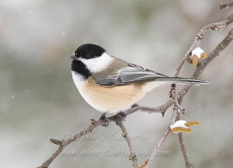 "Black-capped Chickadee © 2007 Nova Mackentley Whitefish Point, MI CHS  <div class=""ss-paypal-button""><div class=""ss-paypal-add-to-cart-section""><div class=""ss-paypal-product-options""><h4>Mat Sizes</h4><ul><li><a href=""https://www.paypal.com/cgi-bin/webscr?cmd=_cart&business=T77V5VKCW4K2U&lc=US&item_name=Black-capped%20Chickadee%20%C2%A9%202007%20Nova%20Mackentley%20Whitefish%20Point%2C%20MI%20CHS&item_number=http%3A%2F%2Fwww.nightflightimages.com%2FGalleries-1%2FUpper-Peninsula-of-MI%2Fi-DgR4wn4&button_subtype=products&no_note=0&cn=Add%20special%20instructions%20to%20the%20seller%3A&no_shipping=2&currency_code=USD&weight_unit=lbs&add=1&bn=PP-ShopCartBF%3Abtn_cart_SM.gif%3ANonHosted&on0=Mat%20Sizes&option_select0=5%20x%207&option_amount0=10.00&option_select1=8%20x%2010&option_amount1=18.00&option_select2=11%20x%2014&option_amount2=28.00&option_select3=card&option_amount3=4.00&option_index=0&charset=utf-8&submit=&os0=5%20x%207"" target=""paypal""><span>5 x 7 $11.00 USD</span><img src=""https://www.paypalobjects.com/en_US/i/btn/btn_cart_SM.gif""></a></li><li><a href=""https://www.paypal.com/cgi-bin/webscr?cmd=_cart&business=T77V5VKCW4K2U&lc=US&item_name=Black-capped%20Chickadee%20%C2%A9%202007%20Nova%20Mackentley%20Whitefish%20Point%2C%20MI%20CHS&item_number=http%3A%2F%2Fwww.nightflightimages.com%2FGalleries-1%2FUpper-Peninsula-of-MI%2Fi-DgR4wn4&button_subtype=products&no_note=0&cn=Add%20special%20instructions%20to%20the%20seller%3A&no_shipping=2&currency_code=USD&weight_unit=lbs&add=1&bn=PP-ShopCartBF%3Abtn_cart_SM.gif%3ANonHosted&on0=Mat%20Sizes&option_select0=5%20x%207&option_amount0=10.00&option_select1=8%20x%2010&option_amount1=18.00&option_select2=11%20x%2014&option_amount2=28.00&option_select3=card&option_amount3=4.00&option_index=0&charset=utf-8&submit=&os0=8%20x%2010"" target=""paypal""><span>8 x 10 $19.00 USD</span><img src=""https://www.paypalobjects.com/en_US/i/btn/btn_cart_SM.gif""></a></li><li><a href=""https://www.paypal.com/cgi-bin/webscr?cmd=_cart&business=T77V5VKCW4K2U&lc=US&item_name=Black-capped%20Chickadee%20%C2%A9%202007%20Nova%20Mackentley%20Whitefish%20Point%2C%20MI%20CHS&item_number=http%3A%2F%2Fwww.nightflightimages.com%2FGalleries-1%2FUpper-Peninsula-of-MI%2Fi-DgR4wn4&button_subtype=products&no_note=0&cn=Add%20special%20instructions%20to%20the%20seller%3A&no_shipping=2&currency_code=USD&weight_unit=lbs&add=1&bn=PP-ShopCartBF%3Abtn_cart_SM.gif%3ANonHosted&on0=Mat%20Sizes&option_select0=5%20x%207&option_amount0=10.00&option_select1=8%20x%2010&option_amount1=18.00&option_select2=11%20x%2014&option_amount2=28.00&option_select3=card&option_amount3=4.00&option_index=0&charset=utf-8&submit=&os0=11%20x%2014"" target=""paypal""><span>11 x 14 $29.00 USD</span><img src=""https://www.paypalobjects.com/en_US/i/btn/btn_cart_SM.gif""></a></li><li><a href=""https://www.paypal.com/cgi-bin/webscr?cmd=_cart&business=T77V5VKCW4K2U&lc=US&item_name=Black-capped%20Chickadee%20%C2%A9%202007%20Nova%20Mackentley%20Whitefish%20Point%2C%20MI%20CHS&item_number=http%3A%2F%2Fwww.nightflightimages.com%2FGalleries-1%2FUpper-Peninsula-of-MI%2Fi-DgR4wn4&button_subtype=products&no_note=0&cn=Add%20special%20instructions%20to%20the%20seller%3A&no_shipping=2&currency_code=USD&weight_unit=lbs&add=1&bn=PP-ShopCartBF%3Abtn_cart_SM.gif%3ANonHosted&on0=Mat%20Sizes&option_select0=5%20x%207&option_amount0=10.00&option_select1=8%20x%2010&option_amount1=18.00&option_select2=11%20x%2014&option_amount2=28.00&option_select3=card&option_amount3=4.00&option_index=0&charset=utf-8&submit=&os0=card"" target=""paypal""><span>card $5.00 USD</span><img src=""https://www.paypalobjects.com/en_US/i/btn/btn_cart_SM.gif""></a></li></ul></div></div> <div class=""ss-paypal-view-cart-section""><a href=""https://www.paypal.com/cgi-bin/webscr?cmd=_cart&business=T77V5VKCW4K2U&display=1&item_name=Black-capped%20Chickadee%20%C2%A9%202007%20Nova%20Mackentley%20Whitefish%20Point%2C%20MI%20CHS&item_number=http%3A%2F%2Fwww.nightflightimages.com%2FGalleries-1%2FUpper-Peninsula-of-MI%2Fi-DgR4wn4&charset=utf-8&submit="" target=""paypal"" class=""ss-paypal-submit-button""><img src=""https://www.paypalobjects.com/en_US/i/btn/btn_viewcart_LG.gif""></a></div></div><div class=""ss-paypal-button-end""></div>"