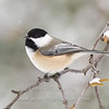 "Black-capped Chickadee © 2007 Nova Mackentley Whitefish Point, MI CHS  <div class=""ss-paypal-button""><div class=""ss-paypal-add-to-cart-section""><div class=""ss-paypal-product-options""><h4>Mat Sizes</h4><ul><li><a href=""https://www.paypal.com/cgi-bin/webscr?cmd=_cart&amp;business=T77V5VKCW4K2U&amp;lc=US&amp;item_name=Black-capped%20Chickadee%20%C2%A9%202007%20Nova%20Mackentley%20Whitefish%20Point%2C%20MI%20CHS&amp;item_number=http%3A%2F%2Fwww.nightflightimages.com%2FGalleries-1%2FUpper-Peninsula-of-MI%2Fi-DgR4wn4&amp;button_subtype=products&amp;no_note=0&amp;cn=Add%20special%20instructions%20to%20the%20seller%3A&amp;no_shipping=2&amp;currency_code=USD&amp;weight_unit=lbs&amp;add=1&amp;bn=PP-ShopCartBF%3Abtn_cart_SM.gif%3ANonHosted&amp;on0=Mat%20Sizes&amp;option_select0=5%20x%207&amp;option_amount0=10.00&amp;option_select1=8%20x%2010&amp;option_amount1=18.00&amp;option_select2=11%20x%2014&amp;option_amount2=28.00&amp;option_select3=card&amp;option_amount3=4.00&amp;option_index=0&amp;charset=utf-8&amp;submit=&amp;os0=5%20x%207"" target=""paypal""><span>5 x 7 $11.00 USD</span><img src=""https://www.paypalobjects.com/en_US/i/btn/btn_cart_SM.gif""></a></li><li><a href=""https://www.paypal.com/cgi-bin/webscr?cmd=_cart&amp;business=T77V5VKCW4K2U&amp;lc=US&amp;item_name=Black-capped%20Chickadee%20%C2%A9%202007%20Nova%20Mackentley%20Whitefish%20Point%2C%20MI%20CHS&amp;item_number=http%3A%2F%2Fwww.nightflightimages.com%2FGalleries-1%2FUpper-Peninsula-of-MI%2Fi-DgR4wn4&amp;button_subtype=products&amp;no_note=0&amp;cn=Add%20special%20instructions%20to%20the%20seller%3A&amp;no_shipping=2&amp;currency_code=USD&amp;weight_unit=lbs&amp;add=1&amp;bn=PP-ShopCartBF%3Abtn_cart_SM.gif%3ANonHosted&amp;on0=Mat%20Sizes&amp;option_select0=5%20x%207&amp;option_amount0=10.00&amp;option_select1=8%20x%2010&amp;option_amount1=18.00&amp;option_select2=11%20x%2014&amp;option_amount2=28.00&amp;option_select3=card&amp;option_amount3=4.00&amp;option_index=0&amp;charset=utf-8&amp;submit=&amp;os0=8%20x%2010"" target=""paypal""><span>8 x 10 $19.00 USD</span><img src=""https://www.paypalobjects.com/en_US/i/btn/btn_cart_SM.gif""></a></li><li><a href=""https://www.paypal.com/cgi-bin/webscr?cmd=_cart&amp;business=T77V5VKCW4K2U&amp;lc=US&amp;item_name=Black-capped%20Chickadee%20%C2%A9%202007%20Nova%20Mackentley%20Whitefish%20Point%2C%20MI%20CHS&amp;item_number=http%3A%2F%2Fwww.nightflightimages.com%2FGalleries-1%2FUpper-Peninsula-of-MI%2Fi-DgR4wn4&amp;button_subtype=products&amp;no_note=0&amp;cn=Add%20special%20instructions%20to%20the%20seller%3A&amp;no_shipping=2&amp;currency_code=USD&amp;weight_unit=lbs&amp;add=1&amp;bn=PP-ShopCartBF%3Abtn_cart_SM.gif%3ANonHosted&amp;on0=Mat%20Sizes&amp;option_select0=5%20x%207&amp;option_amount0=10.00&amp;option_select1=8%20x%2010&amp;option_amount1=18.00&amp;option_select2=11%20x%2014&amp;option_amount2=28.00&amp;option_select3=card&amp;option_amount3=4.00&amp;option_index=0&amp;charset=utf-8&amp;submit=&amp;os0=11%20x%2014"" target=""paypal""><span>11 x 14 $29.00 USD</span><img src=""https://www.paypalobjects.com/en_US/i/btn/btn_cart_SM.gif""></a></li><li><a href=""https://www.paypal.com/cgi-bin/webscr?cmd=_cart&amp;business=T77V5VKCW4K2U&amp;lc=US&amp;item_name=Black-capped%20Chickadee%20%C2%A9%202007%20Nova%20Mackentley%20Whitefish%20Point%2C%20MI%20CHS&amp;item_number=http%3A%2F%2Fwww.nightflightimages.com%2FGalleries-1%2FUpper-Peninsula-of-MI%2Fi-DgR4wn4&amp;button_subtype=products&amp;no_note=0&amp;cn=Add%20special%20instructions%20to%20the%20seller%3A&amp;no_shipping=2&amp;currency_code=USD&amp;weight_unit=lbs&amp;add=1&amp;bn=PP-ShopCartBF%3Abtn_cart_SM.gif%3ANonHosted&amp;on0=Mat%20Sizes&amp;option_select0=5%20x%207&amp;option_amount0=10.00&amp;option_select1=8%20x%2010&amp;option_amount1=18.00&amp;option_select2=11%20x%2014&amp;option_amount2=28.00&amp;option_select3=card&amp;option_amount3=4.00&amp;option_index=0&amp;charset=utf-8&amp;submit=&amp;os0=card"" target=""paypal""><span>card $5.00 USD</span><img src=""https://www.paypalobjects.com/en_US/i/btn/btn_cart_SM.gif""></a></li></ul></div></div> <div class=""ss-paypal-view-cart-section""><a href=""https://www.paypal.com/cgi-bin/webscr?cmd=_cart&amp;business=T77V5VKCW4K2U&amp;display=1&amp;item_name=Black-capped%20Chickadee%20%C2%A9%202007%20Nova%20Mackentley%20Whitefish%20Point%2C%20MI%20CHS&amp;item_number=http%3A%2F%2Fwww.nightflightimages.com%2FGalleries-1%2FUpper-Peninsula-of-MI%2Fi-DgR4wn4&amp;charset=utf-8&amp;submit="" target=""paypal"" class=""ss-paypal-submit-button""><img src=""https://www.paypalobjects.com/en_US/i/btn/btn_viewcart_LG.gif""></a></div></div><div class=""ss-paypal-button-end""></div>"