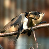 "Barn Swallow adult feeding young © 2008 C. M. Neri Whitefish Point, MI BARS  <div class=""ss-paypal-button""><div class=""ss-paypal-add-to-cart-section""><div class=""ss-paypal-product-options""><h4>Mat Sizes</h4><ul><li><a href=""https://www.paypal.com/cgi-bin/webscr?cmd=_cart&amp;business=T77V5VKCW4K2U&amp;lc=US&amp;item_name=Barn%20Swallow%20adult%20feeding%20young%20%C2%A9%202008%20C.%20M.%20Neri%20Whitefish%20Point%2C%20MI%20BARS&amp;item_number=http%3A%2F%2Fwww.nightflightimages.com%2FGalleries-1%2FUpper-Peninsula-of-MI%2Fi-FZWbVs6&amp;button_subtype=products&amp;no_note=0&amp;cn=Add%20special%20instructions%20to%20the%20seller%3A&amp;no_shipping=2&amp;currency_code=USD&amp;weight_unit=lbs&amp;add=1&amp;bn=PP-ShopCartBF%3Abtn_cart_SM.gif%3ANonHosted&amp;on0=Mat%20Sizes&amp;option_select0=5%20x%207&amp;option_amount0=10.00&amp;option_select1=8%20x%2010&amp;option_amount1=18.00&amp;option_select2=11%20x%2014&amp;option_amount2=28.00&amp;option_select3=card&amp;option_amount3=4.00&amp;option_index=0&amp;charset=utf-8&amp;submit=&amp;os0=5%20x%207"" target=""paypal""><span>5 x 7 $11.00 USD</span><img src=""https://www.paypalobjects.com/en_US/i/btn/btn_cart_SM.gif""></a></li><li><a href=""https://www.paypal.com/cgi-bin/webscr?cmd=_cart&amp;business=T77V5VKCW4K2U&amp;lc=US&amp;item_name=Barn%20Swallow%20adult%20feeding%20young%20%C2%A9%202008%20C.%20M.%20Neri%20Whitefish%20Point%2C%20MI%20BARS&amp;item_number=http%3A%2F%2Fwww.nightflightimages.com%2FGalleries-1%2FUpper-Peninsula-of-MI%2Fi-FZWbVs6&amp;button_subtype=products&amp;no_note=0&amp;cn=Add%20special%20instructions%20to%20the%20seller%3A&amp;no_shipping=2&amp;currency_code=USD&amp;weight_unit=lbs&amp;add=1&amp;bn=PP-ShopCartBF%3Abtn_cart_SM.gif%3ANonHosted&amp;on0=Mat%20Sizes&amp;option_select0=5%20x%207&amp;option_amount0=10.00&amp;option_select1=8%20x%2010&amp;option_amount1=18.00&amp;option_select2=11%20x%2014&amp;option_amount2=28.00&amp;option_select3=card&amp;option_amount3=4.00&amp;option_index=0&amp;charset=utf-8&amp;submit=&amp;os0=8%20x%2010"" target=""paypal""><span>8 x 10 $19.00 USD</span><img src=""https://www.paypalobjects.com/en_US/i/btn/btn_cart_SM.gif""></a></li><li><a href=""https://www.paypal.com/cgi-bin/webscr?cmd=_cart&amp;business=T77V5VKCW4K2U&amp;lc=US&amp;item_name=Barn%20Swallow%20adult%20feeding%20young%20%C2%A9%202008%20C.%20M.%20Neri%20Whitefish%20Point%2C%20MI%20BARS&amp;item_number=http%3A%2F%2Fwww.nightflightimages.com%2FGalleries-1%2FUpper-Peninsula-of-MI%2Fi-FZWbVs6&amp;button_subtype=products&amp;no_note=0&amp;cn=Add%20special%20instructions%20to%20the%20seller%3A&amp;no_shipping=2&amp;currency_code=USD&amp;weight_unit=lbs&amp;add=1&amp;bn=PP-ShopCartBF%3Abtn_cart_SM.gif%3ANonHosted&amp;on0=Mat%20Sizes&amp;option_select0=5%20x%207&amp;option_amount0=10.00&amp;option_select1=8%20x%2010&amp;option_amount1=18.00&amp;option_select2=11%20x%2014&amp;option_amount2=28.00&amp;option_select3=card&amp;option_amount3=4.00&amp;option_index=0&amp;charset=utf-8&amp;submit=&amp;os0=11%20x%2014"" target=""paypal""><span>11 x 14 $29.00 USD</span><img src=""https://www.paypalobjects.com/en_US/i/btn/btn_cart_SM.gif""></a></li><li><a href=""https://www.paypal.com/cgi-bin/webscr?cmd=_cart&amp;business=T77V5VKCW4K2U&amp;lc=US&amp;item_name=Barn%20Swallow%20adult%20feeding%20young%20%C2%A9%202008%20C.%20M.%20Neri%20Whitefish%20Point%2C%20MI%20BARS&amp;item_number=http%3A%2F%2Fwww.nightflightimages.com%2FGalleries-1%2FUpper-Peninsula-of-MI%2Fi-FZWbVs6&amp;button_subtype=products&amp;no_note=0&amp;cn=Add%20special%20instructions%20to%20the%20seller%3A&amp;no_shipping=2&amp;currency_code=USD&amp;weight_unit=lbs&amp;add=1&amp;bn=PP-ShopCartBF%3Abtn_cart_SM.gif%3ANonHosted&amp;on0=Mat%20Sizes&amp;option_select0=5%20x%207&amp;option_amount0=10.00&amp;option_select1=8%20x%2010&amp;option_amount1=18.00&amp;option_select2=11%20x%2014&amp;option_amount2=28.00&amp;option_select3=card&amp;option_amount3=4.00&amp;option_index=0&amp;charset=utf-8&amp;submit=&amp;os0=card"" target=""paypal""><span>card $5.00 USD</span><img src=""https://www.paypalobjects.com/en_US/i/btn/btn_cart_SM.gif""></a></li></ul></div></div> <div class=""ss-paypal-view-cart-section""><a href=""https://www.paypal.com/cgi-bin/webscr?cmd=_cart&amp;business=T77V5VKCW4K2U&amp;display=1&amp;item_name=Barn%20Swallow%20adult%20feeding%20young%20%C2%A9%202008%20C.%20M.%20Neri%20Whitefish%20Point%2C%20MI%20BARS&amp;item_number=http%3A%2F%2Fwww.nightflightimages.com%2FGalleries-1%2FUpper-Peninsula-of-MI%2Fi-FZWbVs6&amp;charset=utf-8&amp;submit="" target=""paypal"" class=""ss-paypal-submit-button""><img src=""https://www.paypalobjects.com/en_US/i/btn/btn_viewcart_LG.gif""></a></div></div><div class=""ss-paypal-button-end""></div>"