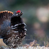 "Spruce Grouse male display © 2011 Nova Mackentley Tahquamenon Falls SP, MI SGL  <div class=""ss-paypal-button""><div class=""ss-paypal-add-to-cart-section""><div class=""ss-paypal-product-options""><h4>Mat Sizes</h4><ul><li><a href=""https://www.paypal.com/cgi-bin/webscr?cmd=_cart&amp;business=T77V5VKCW4K2U&amp;lc=US&amp;item_name=Spruce%20Grouse%20male%20display%20%C2%A9%202011%20Nova%20Mackentley%20Tahquamenon%20Falls%20SP%2C%20MI%20SGL&amp;item_number=http%3A%2F%2Fwww.nightflightimages.com%2FGalleries-1%2FUpper-Peninsula-of-MI%2Fi-Fh8N2Gv&amp;button_subtype=products&amp;no_note=0&amp;cn=Add%20special%20instructions%20to%20the%20seller%3A&amp;no_shipping=2&amp;currency_code=USD&amp;weight_unit=lbs&amp;add=1&amp;bn=PP-ShopCartBF%3Abtn_cart_SM.gif%3ANonHosted&amp;on0=Mat%20Sizes&amp;option_select0=5%20x%207&amp;option_amount0=10.00&amp;option_select1=8%20x%2010&amp;option_amount1=18.00&amp;option_select2=11%20x%2014&amp;option_amount2=28.00&amp;option_select3=card&amp;option_amount3=4.00&amp;option_index=0&amp;charset=utf-8&amp;submit=&amp;os0=5%20x%207"" target=""paypal""><span>5 x 7 $11.00 USD</span><img src=""https://www.paypalobjects.com/en_US/i/btn/btn_cart_SM.gif""></a></li><li><a href=""https://www.paypal.com/cgi-bin/webscr?cmd=_cart&amp;business=T77V5VKCW4K2U&amp;lc=US&amp;item_name=Spruce%20Grouse%20male%20display%20%C2%A9%202011%20Nova%20Mackentley%20Tahquamenon%20Falls%20SP%2C%20MI%20SGL&amp;item_number=http%3A%2F%2Fwww.nightflightimages.com%2FGalleries-1%2FUpper-Peninsula-of-MI%2Fi-Fh8N2Gv&amp;button_subtype=products&amp;no_note=0&amp;cn=Add%20special%20instructions%20to%20the%20seller%3A&amp;no_shipping=2&amp;currency_code=USD&amp;weight_unit=lbs&amp;add=1&amp;bn=PP-ShopCartBF%3Abtn_cart_SM.gif%3ANonHosted&amp;on0=Mat%20Sizes&amp;option_select0=5%20x%207&amp;option_amount0=10.00&amp;option_select1=8%20x%2010&amp;option_amount1=18.00&amp;option_select2=11%20x%2014&amp;option_amount2=28.00&amp;option_select3=card&amp;option_amount3=4.00&amp;option_index=0&amp;charset=utf-8&amp;submit=&amp;os0=8%20x%2010"" target=""paypal""><span>8 x 10 $19.00 USD</span><img src=""https://www.paypalobjects.com/en_US/i/btn/btn_cart_SM.gif""></a></li><li><a href=""https://www.paypal.com/cgi-bin/webscr?cmd=_cart&amp;business=T77V5VKCW4K2U&amp;lc=US&amp;item_name=Spruce%20Grouse%20male%20display%20%C2%A9%202011%20Nova%20Mackentley%20Tahquamenon%20Falls%20SP%2C%20MI%20SGL&amp;item_number=http%3A%2F%2Fwww.nightflightimages.com%2FGalleries-1%2FUpper-Peninsula-of-MI%2Fi-Fh8N2Gv&amp;button_subtype=products&amp;no_note=0&amp;cn=Add%20special%20instructions%20to%20the%20seller%3A&amp;no_shipping=2&amp;currency_code=USD&amp;weight_unit=lbs&amp;add=1&amp;bn=PP-ShopCartBF%3Abtn_cart_SM.gif%3ANonHosted&amp;on0=Mat%20Sizes&amp;option_select0=5%20x%207&amp;option_amount0=10.00&amp;option_select1=8%20x%2010&amp;option_amount1=18.00&amp;option_select2=11%20x%2014&amp;option_amount2=28.00&amp;option_select3=card&amp;option_amount3=4.00&amp;option_index=0&amp;charset=utf-8&amp;submit=&amp;os0=11%20x%2014"" target=""paypal""><span>11 x 14 $29.00 USD</span><img src=""https://www.paypalobjects.com/en_US/i/btn/btn_cart_SM.gif""></a></li><li><a href=""https://www.paypal.com/cgi-bin/webscr?cmd=_cart&amp;business=T77V5VKCW4K2U&amp;lc=US&amp;item_name=Spruce%20Grouse%20male%20display%20%C2%A9%202011%20Nova%20Mackentley%20Tahquamenon%20Falls%20SP%2C%20MI%20SGL&amp;item_number=http%3A%2F%2Fwww.nightflightimages.com%2FGalleries-1%2FUpper-Peninsula-of-MI%2Fi-Fh8N2Gv&amp;button_subtype=products&amp;no_note=0&amp;cn=Add%20special%20instructions%20to%20the%20seller%3A&amp;no_shipping=2&amp;currency_code=USD&amp;weight_unit=lbs&amp;add=1&amp;bn=PP-ShopCartBF%3Abtn_cart_SM.gif%3ANonHosted&amp;on0=Mat%20Sizes&amp;option_select0=5%20x%207&amp;option_amount0=10.00&amp;option_select1=8%20x%2010&amp;option_amount1=18.00&amp;option_select2=11%20x%2014&amp;option_amount2=28.00&amp;option_select3=card&amp;option_amount3=4.00&amp;option_index=0&amp;charset=utf-8&amp;submit=&amp;os0=card"" target=""paypal""><span>card $5.00 USD</span><img src=""https://www.paypalobjects.com/en_US/i/btn/btn_cart_SM.gif""></a></li></ul></div></div> <div class=""ss-paypal-view-cart-section""><a href=""https://www.paypal.com/cgi-bin/webscr?cmd=_cart&amp;business=T77V5VKCW4K2U&amp;display=1&amp;item_name=Spruce%20Grouse%20male%20display%20%C2%A9%202011%20Nova%20Mackentley%20Tahquamenon%20Falls%20SP%2C%20MI%20SGL&amp;item_number=http%3A%2F%2Fwww.nightflightimages.com%2FGalleries-1%2FUpper-Peninsula-of-MI%2Fi-Fh8N2Gv&amp;charset=utf-8&amp;submit="" target=""paypal"" class=""ss-paypal-submit-button""><img src=""https://www.paypalobjects.com/en_US/i/btn/btn_viewcart_LG.gif""></a></div></div><div class=""ss-paypal-button-end""></div>"