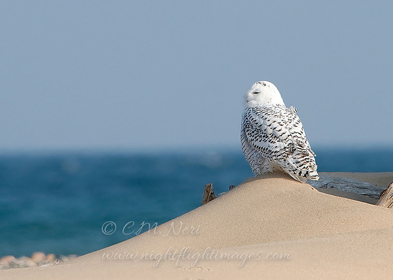 "Snowy Owl  © 2008 C. M. Neri  Whitefish Point, MI SNOWYDUNE  <div class=""ss-paypal-button""><div class=""ss-paypal-add-to-cart-section""><div class=""ss-paypal-product-options""><h4>Mat Sizes</h4><ul><li><a href=""https://www.paypal.com/cgi-bin/webscr?cmd=_cart&business=T77V5VKCW4K2U&lc=US&item_name=Snowy%20Owl%20%20%C2%A9%202008%20C.%20M.%20Neri%20%20Whitefish%20Point%2C%20MI%20SNOWYDUNE&item_number=http%3A%2F%2Fwww.nightflightimages.com%2FGalleries-1%2FUpper-Peninsula-of-MI%2Fi-HJsMBxB&button_subtype=products&no_note=0&cn=Add%20special%20instructions%20to%20the%20seller%3A&no_shipping=2&currency_code=USD&weight_unit=lbs&add=1&bn=PP-ShopCartBF%3Abtn_cart_SM.gif%3ANonHosted&on0=Mat%20Sizes&option_select0=5%20x%207&option_amount0=10.00&option_select1=8%20x%2010&option_amount1=18.00&option_select2=11%20x%2014&option_amount2=28.00&option_select3=card&option_amount3=4.00&option_index=0&charset=utf-8&submit=&os0=5%20x%207"" target=""paypal""><span>5 x 7 $11.00 USD</span><img src=""https://www.paypalobjects.com/en_US/i/btn/btn_cart_SM.gif""></a></li><li><a href=""https://www.paypal.com/cgi-bin/webscr?cmd=_cart&business=T77V5VKCW4K2U&lc=US&item_name=Snowy%20Owl%20%20%C2%A9%202008%20C.%20M.%20Neri%20%20Whitefish%20Point%2C%20MI%20SNOWYDUNE&item_number=http%3A%2F%2Fwww.nightflightimages.com%2FGalleries-1%2FUpper-Peninsula-of-MI%2Fi-HJsMBxB&button_subtype=products&no_note=0&cn=Add%20special%20instructions%20to%20the%20seller%3A&no_shipping=2&currency_code=USD&weight_unit=lbs&add=1&bn=PP-ShopCartBF%3Abtn_cart_SM.gif%3ANonHosted&on0=Mat%20Sizes&option_select0=5%20x%207&option_amount0=10.00&option_select1=8%20x%2010&option_amount1=18.00&option_select2=11%20x%2014&option_amount2=28.00&option_select3=card&option_amount3=4.00&option_index=0&charset=utf-8&submit=&os0=8%20x%2010"" target=""paypal""><span>8 x 10 $19.00 USD</span><img src=""https://www.paypalobjects.com/en_US/i/btn/btn_cart_SM.gif""></a></li><li><a href=""https://www.paypal.com/cgi-bin/webscr?cmd=_cart&business=T77V5VKCW4K2U&lc=US&item_name=Snowy%20Owl%20%20%C2%A9%202008%20C.%20M.%20Neri%20%20Whitefish%20Point%2C%20MI%20SNOWYDUNE&item_number=http%3A%2F%2Fwww.nightflightimages.com%2FGalleries-1%2FUpper-Peninsula-of-MI%2Fi-HJsMBxB&button_subtype=products&no_note=0&cn=Add%20special%20instructions%20to%20the%20seller%3A&no_shipping=2&currency_code=USD&weight_unit=lbs&add=1&bn=PP-ShopCartBF%3Abtn_cart_SM.gif%3ANonHosted&on0=Mat%20Sizes&option_select0=5%20x%207&option_amount0=10.00&option_select1=8%20x%2010&option_amount1=18.00&option_select2=11%20x%2014&option_amount2=28.00&option_select3=card&option_amount3=4.00&option_index=0&charset=utf-8&submit=&os0=11%20x%2014"" target=""paypal""><span>11 x 14 $29.00 USD</span><img src=""https://www.paypalobjects.com/en_US/i/btn/btn_cart_SM.gif""></a></li><li><a href=""https://www.paypal.com/cgi-bin/webscr?cmd=_cart&business=T77V5VKCW4K2U&lc=US&item_name=Snowy%20Owl%20%20%C2%A9%202008%20C.%20M.%20Neri%20%20Whitefish%20Point%2C%20MI%20SNOWYDUNE&item_number=http%3A%2F%2Fwww.nightflightimages.com%2FGalleries-1%2FUpper-Peninsula-of-MI%2Fi-HJsMBxB&button_subtype=products&no_note=0&cn=Add%20special%20instructions%20to%20the%20seller%3A&no_shipping=2&currency_code=USD&weight_unit=lbs&add=1&bn=PP-ShopCartBF%3Abtn_cart_SM.gif%3ANonHosted&on0=Mat%20Sizes&option_select0=5%20x%207&option_amount0=10.00&option_select1=8%20x%2010&option_amount1=18.00&option_select2=11%20x%2014&option_amount2=28.00&option_select3=card&option_amount3=4.00&option_index=0&charset=utf-8&submit=&os0=card"" target=""paypal""><span>card $5.00 USD</span><img src=""https://www.paypalobjects.com/en_US/i/btn/btn_cart_SM.gif""></a></li></ul></div></div> <div class=""ss-paypal-view-cart-section""><a href=""https://www.paypal.com/cgi-bin/webscr?cmd=_cart&business=T77V5VKCW4K2U&display=1&item_name=Snowy%20Owl%20%20%C2%A9%202008%20C.%20M.%20Neri%20%20Whitefish%20Point%2C%20MI%20SNOWYDUNE&item_number=http%3A%2F%2Fwww.nightflightimages.com%2FGalleries-1%2FUpper-Peninsula-of-MI%2Fi-HJsMBxB&charset=utf-8&submit="" target=""paypal"" class=""ss-paypal-submit-button""><img src=""https://www.paypalobjects.com/en_US/i/btn/btn_viewcart_LG.gif""></a></div></div><div class=""ss-paypal-button-end""></div>"