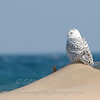 "Snowy Owl  © 2008 C. M. Neri  Whitefish Point, MI SNOWYDUNE  <div class=""ss-paypal-button""><div class=""ss-paypal-add-to-cart-section""><div class=""ss-paypal-product-options""><h4>Mat Sizes</h4><ul><li><a href=""https://www.paypal.com/cgi-bin/webscr?cmd=_cart&amp;business=T77V5VKCW4K2U&amp;lc=US&amp;item_name=Snowy%20Owl%20%20%C2%A9%202008%20C.%20M.%20Neri%20%20Whitefish%20Point%2C%20MI%20SNOWYDUNE&amp;item_number=http%3A%2F%2Fwww.nightflightimages.com%2FGalleries-1%2FUpper-Peninsula-of-MI%2Fi-HJsMBxB&amp;button_subtype=products&amp;no_note=0&amp;cn=Add%20special%20instructions%20to%20the%20seller%3A&amp;no_shipping=2&amp;currency_code=USD&amp;weight_unit=lbs&amp;add=1&amp;bn=PP-ShopCartBF%3Abtn_cart_SM.gif%3ANonHosted&amp;on0=Mat%20Sizes&amp;option_select0=5%20x%207&amp;option_amount0=10.00&amp;option_select1=8%20x%2010&amp;option_amount1=18.00&amp;option_select2=11%20x%2014&amp;option_amount2=28.00&amp;option_select3=card&amp;option_amount3=4.00&amp;option_index=0&amp;charset=utf-8&amp;submit=&amp;os0=5%20x%207"" target=""paypal""><span>5 x 7 $11.00 USD</span><img src=""https://www.paypalobjects.com/en_US/i/btn/btn_cart_SM.gif""></a></li><li><a href=""https://www.paypal.com/cgi-bin/webscr?cmd=_cart&amp;business=T77V5VKCW4K2U&amp;lc=US&amp;item_name=Snowy%20Owl%20%20%C2%A9%202008%20C.%20M.%20Neri%20%20Whitefish%20Point%2C%20MI%20SNOWYDUNE&amp;item_number=http%3A%2F%2Fwww.nightflightimages.com%2FGalleries-1%2FUpper-Peninsula-of-MI%2Fi-HJsMBxB&amp;button_subtype=products&amp;no_note=0&amp;cn=Add%20special%20instructions%20to%20the%20seller%3A&amp;no_shipping=2&amp;currency_code=USD&amp;weight_unit=lbs&amp;add=1&amp;bn=PP-ShopCartBF%3Abtn_cart_SM.gif%3ANonHosted&amp;on0=Mat%20Sizes&amp;option_select0=5%20x%207&amp;option_amount0=10.00&amp;option_select1=8%20x%2010&amp;option_amount1=18.00&amp;option_select2=11%20x%2014&amp;option_amount2=28.00&amp;option_select3=card&amp;option_amount3=4.00&amp;option_index=0&amp;charset=utf-8&amp;submit=&amp;os0=8%20x%2010"" target=""paypal""><span>8 x 10 $19.00 USD</span><img src=""https://www.paypalobjects.com/en_US/i/btn/btn_cart_SM.gif""></a></li><li><a href=""https://www.paypal.com/cgi-bin/webscr?cmd=_cart&amp;business=T77V5VKCW4K2U&amp;lc=US&amp;item_name=Snowy%20Owl%20%20%C2%A9%202008%20C.%20M.%20Neri%20%20Whitefish%20Point%2C%20MI%20SNOWYDUNE&amp;item_number=http%3A%2F%2Fwww.nightflightimages.com%2FGalleries-1%2FUpper-Peninsula-of-MI%2Fi-HJsMBxB&amp;button_subtype=products&amp;no_note=0&amp;cn=Add%20special%20instructions%20to%20the%20seller%3A&amp;no_shipping=2&amp;currency_code=USD&amp;weight_unit=lbs&amp;add=1&amp;bn=PP-ShopCartBF%3Abtn_cart_SM.gif%3ANonHosted&amp;on0=Mat%20Sizes&amp;option_select0=5%20x%207&amp;option_amount0=10.00&amp;option_select1=8%20x%2010&amp;option_amount1=18.00&amp;option_select2=11%20x%2014&amp;option_amount2=28.00&amp;option_select3=card&amp;option_amount3=4.00&amp;option_index=0&amp;charset=utf-8&amp;submit=&amp;os0=11%20x%2014"" target=""paypal""><span>11 x 14 $29.00 USD</span><img src=""https://www.paypalobjects.com/en_US/i/btn/btn_cart_SM.gif""></a></li><li><a href=""https://www.paypal.com/cgi-bin/webscr?cmd=_cart&amp;business=T77V5VKCW4K2U&amp;lc=US&amp;item_name=Snowy%20Owl%20%20%C2%A9%202008%20C.%20M.%20Neri%20%20Whitefish%20Point%2C%20MI%20SNOWYDUNE&amp;item_number=http%3A%2F%2Fwww.nightflightimages.com%2FGalleries-1%2FUpper-Peninsula-of-MI%2Fi-HJsMBxB&amp;button_subtype=products&amp;no_note=0&amp;cn=Add%20special%20instructions%20to%20the%20seller%3A&amp;no_shipping=2&amp;currency_code=USD&amp;weight_unit=lbs&amp;add=1&amp;bn=PP-ShopCartBF%3Abtn_cart_SM.gif%3ANonHosted&amp;on0=Mat%20Sizes&amp;option_select0=5%20x%207&amp;option_amount0=10.00&amp;option_select1=8%20x%2010&amp;option_amount1=18.00&amp;option_select2=11%20x%2014&amp;option_amount2=28.00&amp;option_select3=card&amp;option_amount3=4.00&amp;option_index=0&amp;charset=utf-8&amp;submit=&amp;os0=card"" target=""paypal""><span>card $5.00 USD</span><img src=""https://www.paypalobjects.com/en_US/i/btn/btn_cart_SM.gif""></a></li></ul></div></div> <div class=""ss-paypal-view-cart-section""><a href=""https://www.paypal.com/cgi-bin/webscr?cmd=_cart&amp;business=T77V5VKCW4K2U&amp;display=1&amp;item_name=Snowy%20Owl%20%20%C2%A9%202008%20C.%20M.%20Neri%20%20Whitefish%20Point%2C%20MI%20SNOWYDUNE&amp;item_number=http%3A%2F%2Fwww.nightflightimages.com%2FGalleries-1%2FUpper-Peninsula-of-MI%2Fi-HJsMBxB&amp;charset=utf-8&amp;submit="" target=""paypal"" class=""ss-paypal-submit-button""><img src=""https://www.paypalobjects.com/en_US/i/btn/btn_viewcart_LG.gif""></a></div></div><div class=""ss-paypal-button-end""></div>"