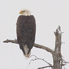 "Bald Eagle © 2007 Nova Mackentley Paradise, MI BES  <div class=""ss-paypal-button""><div class=""ss-paypal-add-to-cart-section""><div class=""ss-paypal-product-options""><h4>Mat Sizes</h4><ul><li><a href=""https://www.paypal.com/cgi-bin/webscr?cmd=_cart&business=T77V5VKCW4K2U&lc=US&item_name=Bald%20Eagle%20%C2%A9%202007%20Nova%20Mackentley%20Paradise%2C%20MI%20BES&item_number=http%3A%2F%2Fwww.nightflightimages.com%2FGalleries-1%2FHawks%2Fi-HsW3R6H&button_subtype=products&no_note=0&cn=Add%20special%20instructions%20to%20the%20seller%3A&no_shipping=2&currency_code=USD&weight_unit=lbs&add=1&bn=PP-ShopCartBF%3Abtn_cart_SM.gif%3ANonHosted&on0=Mat%20Sizes&option_select0=5%20x%207&option_amount0=10.00&option_select1=8%20x%2010&option_amount1=18.00&option_select2=11%20x%2014&option_amount2=28.00&option_select3=card&option_amount3=4.00&option_index=0&charset=utf-8&submit=&os0=5%20x%207"" target=""paypal""><span>5 x 7 $11.00 USD</span><img src=""https://www.paypalobjects.com/en_US/i/btn/btn_cart_SM.gif""></a></li><li><a href=""https://www.paypal.com/cgi-bin/webscr?cmd=_cart&business=T77V5VKCW4K2U&lc=US&item_name=Bald%20Eagle%20%C2%A9%202007%20Nova%20Mackentley%20Paradise%2C%20MI%20BES&item_number=http%3A%2F%2Fwww.nightflightimages.com%2FGalleries-1%2FHawks%2Fi-HsW3R6H&button_subtype=products&no_note=0&cn=Add%20special%20instructions%20to%20the%20seller%3A&no_shipping=2&currency_code=USD&weight_unit=lbs&add=1&bn=PP-ShopCartBF%3Abtn_cart_SM.gif%3ANonHosted&on0=Mat%20Sizes&option_select0=5%20x%207&option_amount0=10.00&option_select1=8%20x%2010&option_amount1=18.00&option_select2=11%20x%2014&option_amount2=28.00&option_select3=card&option_amount3=4.00&option_index=0&charset=utf-8&submit=&os0=8%20x%2010"" target=""paypal""><span>8 x 10 $19.00 USD</span><img src=""https://www.paypalobjects.com/en_US/i/btn/btn_cart_SM.gif""></a></li><li><a href=""https://www.paypal.com/cgi-bin/webscr?cmd=_cart&business=T77V5VKCW4K2U&lc=US&item_name=Bald%20Eagle%20%C2%A9%202007%20Nova%20Mackentley%20Paradise%2C%20MI%20BES&item_number=http%3A%2F%2Fwww.nightflightimages.com%2FGalleries-1%2FHawks%2Fi-HsW3R6H&button_subtype=products&no_note=0&cn=Add%20special%20instructions%20to%20the%20seller%3A&no_shipping=2&currency_code=USD&weight_unit=lbs&add=1&bn=PP-ShopCartBF%3Abtn_cart_SM.gif%3ANonHosted&on0=Mat%20Sizes&option_select0=5%20x%207&option_amount0=10.00&option_select1=8%20x%2010&option_amount1=18.00&option_select2=11%20x%2014&option_amount2=28.00&option_select3=card&option_amount3=4.00&option_index=0&charset=utf-8&submit=&os0=11%20x%2014"" target=""paypal""><span>11 x 14 $29.00 USD</span><img src=""https://www.paypalobjects.com/en_US/i/btn/btn_cart_SM.gif""></a></li><li><a href=""https://www.paypal.com/cgi-bin/webscr?cmd=_cart&business=T77V5VKCW4K2U&lc=US&item_name=Bald%20Eagle%20%C2%A9%202007%20Nova%20Mackentley%20Paradise%2C%20MI%20BES&item_number=http%3A%2F%2Fwww.nightflightimages.com%2FGalleries-1%2FHawks%2Fi-HsW3R6H&button_subtype=products&no_note=0&cn=Add%20special%20instructions%20to%20the%20seller%3A&no_shipping=2&currency_code=USD&weight_unit=lbs&add=1&bn=PP-ShopCartBF%3Abtn_cart_SM.gif%3ANonHosted&on0=Mat%20Sizes&option_select0=5%20x%207&option_amount0=10.00&option_select1=8%20x%2010&option_amount1=18.00&option_select2=11%20x%2014&option_amount2=28.00&option_select3=card&option_amount3=4.00&option_index=0&charset=utf-8&submit=&os0=card"" target=""paypal""><span>card $5.00 USD</span><img src=""https://www.paypalobjects.com/en_US/i/btn/btn_cart_SM.gif""></a></li></ul></div></div> <div class=""ss-paypal-view-cart-section""><a href=""https://www.paypal.com/cgi-bin/webscr?cmd=_cart&business=T77V5VKCW4K2U&display=1&item_name=Bald%20Eagle%20%C2%A9%202007%20Nova%20Mackentley%20Paradise%2C%20MI%20BES&item_number=http%3A%2F%2Fwww.nightflightimages.com%2FGalleries-1%2FHawks%2Fi-HsW3R6H&charset=utf-8&submit="" target=""paypal"" class=""ss-paypal-submit-button""><img src=""https://www.paypalobjects.com/en_US/i/btn/btn_viewcart_LG.gif""></a></div></div><div class=""ss-paypal-button-end""></div>"