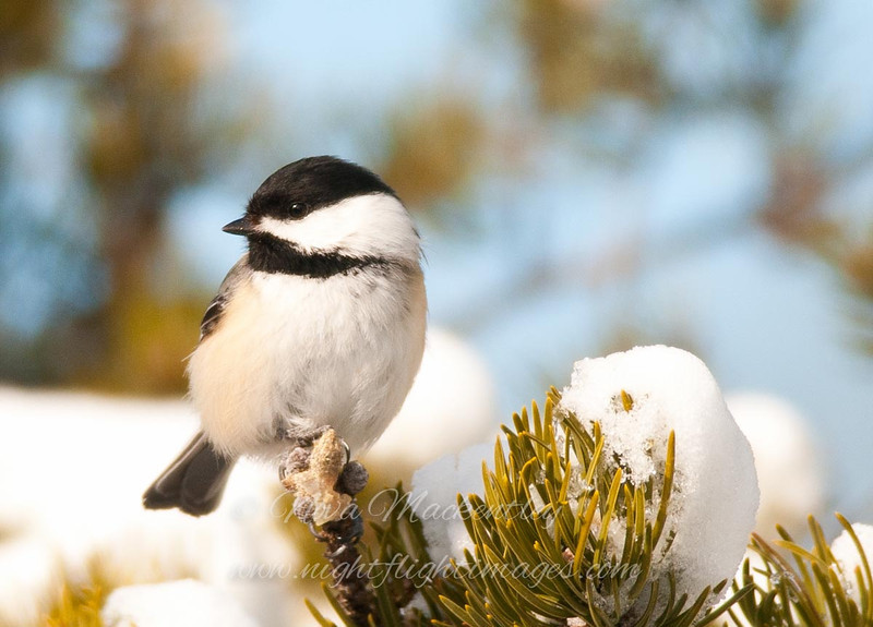 "Black-capped Chickadee © 2013 Nova Mackentley Whitefish Point, MI CHC  <div class=""ss-paypal-button""><div class=""ss-paypal-add-to-cart-section""><div class=""ss-paypal-product-options""><h4>Mat Sizes</h4><ul><li><a href=""https://www.paypal.com/cgi-bin/webscr?cmd=_cart&business=T77V5VKCW4K2U&lc=US&item_name=Black-capped%20Chickadee%20%C2%A9%202013%20Nova%20Mackentley%20Whitefish%20Point%2C%20MI%20CHC&item_number=http%3A%2F%2Fwww.nightflightimages.com%2FGalleries-1%2FUpper-Peninsula-of-MI%2Fi-Jr3f3PZ&button_subtype=products&no_note=0&cn=Add%20special%20instructions%20to%20the%20seller%3A&no_shipping=2&currency_code=USD&weight_unit=lbs&add=1&bn=PP-ShopCartBF%3Abtn_cart_SM.gif%3ANonHosted&on0=Mat%20Sizes&option_select0=5%20x%207&option_amount0=10.00&option_select1=8%20x%2010&option_amount1=18.00&option_select2=11%20x%2014&option_amount2=28.00&option_select3=card&option_amount3=4.00&option_index=0&charset=utf-8&submit=&os0=5%20x%207"" target=""paypal""><span>5 x 7 $11.00 USD</span><img src=""https://www.paypalobjects.com/en_US/i/btn/btn_cart_SM.gif""></a></li><li><a href=""https://www.paypal.com/cgi-bin/webscr?cmd=_cart&business=T77V5VKCW4K2U&lc=US&item_name=Black-capped%20Chickadee%20%C2%A9%202013%20Nova%20Mackentley%20Whitefish%20Point%2C%20MI%20CHC&item_number=http%3A%2F%2Fwww.nightflightimages.com%2FGalleries-1%2FUpper-Peninsula-of-MI%2Fi-Jr3f3PZ&button_subtype=products&no_note=0&cn=Add%20special%20instructions%20to%20the%20seller%3A&no_shipping=2&currency_code=USD&weight_unit=lbs&add=1&bn=PP-ShopCartBF%3Abtn_cart_SM.gif%3ANonHosted&on0=Mat%20Sizes&option_select0=5%20x%207&option_amount0=10.00&option_select1=8%20x%2010&option_amount1=18.00&option_select2=11%20x%2014&option_amount2=28.00&option_select3=card&option_amount3=4.00&option_index=0&charset=utf-8&submit=&os0=8%20x%2010"" target=""paypal""><span>8 x 10 $19.00 USD</span><img src=""https://www.paypalobjects.com/en_US/i/btn/btn_cart_SM.gif""></a></li><li><a href=""https://www.paypal.com/cgi-bin/webscr?cmd=_cart&business=T77V5VKCW4K2U&lc=US&item_name=Black-capped%20Chickadee%20%C2%A9%202013%20Nova%20Mackentley%20Whitefish%20Point%2C%20MI%20CHC&item_number=http%3A%2F%2Fwww.nightflightimages.com%2FGalleries-1%2FUpper-Peninsula-of-MI%2Fi-Jr3f3PZ&button_subtype=products&no_note=0&cn=Add%20special%20instructions%20to%20the%20seller%3A&no_shipping=2&currency_code=USD&weight_unit=lbs&add=1&bn=PP-ShopCartBF%3Abtn_cart_SM.gif%3ANonHosted&on0=Mat%20Sizes&option_select0=5%20x%207&option_amount0=10.00&option_select1=8%20x%2010&option_amount1=18.00&option_select2=11%20x%2014&option_amount2=28.00&option_select3=card&option_amount3=4.00&option_index=0&charset=utf-8&submit=&os0=11%20x%2014"" target=""paypal""><span>11 x 14 $29.00 USD</span><img src=""https://www.paypalobjects.com/en_US/i/btn/btn_cart_SM.gif""></a></li><li><a href=""https://www.paypal.com/cgi-bin/webscr?cmd=_cart&business=T77V5VKCW4K2U&lc=US&item_name=Black-capped%20Chickadee%20%C2%A9%202013%20Nova%20Mackentley%20Whitefish%20Point%2C%20MI%20CHC&item_number=http%3A%2F%2Fwww.nightflightimages.com%2FGalleries-1%2FUpper-Peninsula-of-MI%2Fi-Jr3f3PZ&button_subtype=products&no_note=0&cn=Add%20special%20instructions%20to%20the%20seller%3A&no_shipping=2&currency_code=USD&weight_unit=lbs&add=1&bn=PP-ShopCartBF%3Abtn_cart_SM.gif%3ANonHosted&on0=Mat%20Sizes&option_select0=5%20x%207&option_amount0=10.00&option_select1=8%20x%2010&option_amount1=18.00&option_select2=11%20x%2014&option_amount2=28.00&option_select3=card&option_amount3=4.00&option_index=0&charset=utf-8&submit=&os0=card"" target=""paypal""><span>card $5.00 USD</span><img src=""https://www.paypalobjects.com/en_US/i/btn/btn_cart_SM.gif""></a></li></ul></div></div> <div class=""ss-paypal-view-cart-section""><a href=""https://www.paypal.com/cgi-bin/webscr?cmd=_cart&business=T77V5VKCW4K2U&display=1&item_name=Black-capped%20Chickadee%20%C2%A9%202013%20Nova%20Mackentley%20Whitefish%20Point%2C%20MI%20CHC&item_number=http%3A%2F%2Fwww.nightflightimages.com%2FGalleries-1%2FUpper-Peninsula-of-MI%2Fi-Jr3f3PZ&charset=utf-8&submit="" target=""paypal"" class=""ss-paypal-submit-button""><img src=""https://www.paypalobjects.com/en_US/i/btn/btn_viewcart_LG.gif""></a></div></div><div class=""ss-paypal-button-end""></div>"
