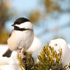 """Black-capped Chickadee © 2013 Nova Mackentley Whitefish Point, MI CHC  <div class=""""ss-paypal-button""""><div class=""""ss-paypal-add-to-cart-section""""><div class=""""ss-paypal-product-options""""><h4>Mat Sizes</h4><ul><li><a href=""""https://www.paypal.com/cgi-bin/webscr?cmd=_cart&business=T77V5VKCW4K2U&lc=US&item_name=Black-capped%20Chickadee%20%C2%A9%202013%20Nova%20Mackentley%20Whitefish%20Point%2C%20MI%20CHC&item_number=http%3A%2F%2Fwww.nightflightimages.com%2FGalleries-1%2FUpper-Peninsula-of-MI%2Fi-Jr3f3PZ&button_subtype=products&no_note=0&cn=Add%20special%20instructions%20to%20the%20seller%3A&no_shipping=2&currency_code=USD&weight_unit=lbs&add=1&bn=PP-ShopCartBF%3Abtn_cart_SM.gif%3ANonHosted&on0=Mat%20Sizes&option_select0=5%20x%207&option_amount0=10.00&option_select1=8%20x%2010&option_amount1=18.00&option_select2=11%20x%2014&option_amount2=28.00&option_select3=card&option_amount3=4.00&option_index=0&charset=utf-8&submit=&os0=5%20x%207"""" target=""""paypal""""><span>5 x 7 $11.00 USD</span><img src=""""https://www.paypalobjects.com/en_US/i/btn/btn_cart_SM.gif""""></a></li><li><a href=""""https://www.paypal.com/cgi-bin/webscr?cmd=_cart&business=T77V5VKCW4K2U&lc=US&item_name=Black-capped%20Chickadee%20%C2%A9%202013%20Nova%20Mackentley%20Whitefish%20Point%2C%20MI%20CHC&item_number=http%3A%2F%2Fwww.nightflightimages.com%2FGalleries-1%2FUpper-Peninsula-of-MI%2Fi-Jr3f3PZ&button_subtype=products&no_note=0&cn=Add%20special%20instructions%20to%20the%20seller%3A&no_shipping=2&currency_code=USD&weight_unit=lbs&add=1&bn=PP-ShopCartBF%3Abtn_cart_SM.gif%3ANonHosted&on0=Mat%20Sizes&option_select0=5%20x%207&option_amount0=10.00&option_select1=8%20x%2010&option_amount1=18.00&option_select2=11%20x%2014&option_amount2=28.00&option_select3=card&option_amount3=4.00&option_index=0&charset=utf-8&submit=&os0=8%20x%2010"""" target=""""paypal""""><span>8 x 10 $19.00 USD</span><img src=""""https://www.paypalobjects.com/en_US/i/btn/btn_cart_SM.gif""""></a></li><li><a href=""""https://www.paypal.com/cgi-bin/webscr?cmd=_cart&business=T77V5VK"""