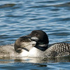"Loon Family © 2008 Nova Mackentley Seney NWR, MI LOF facing)  <div class=""ss-paypal-button""><div class=""ss-paypal-add-to-cart-section""><div class=""ss-paypal-product-options""><h4>Mat Sizes</h4><ul><li><a href=""https://www.paypal.com/cgi-bin/webscr?cmd=_cart&business=T77V5VKCW4K2U&lc=US&item_name=Loon%20Family%20%C2%A9%202008%20Nova%20Mackentley%20Seney%20NWR%2C%20MI%20LOF%20facing)&item_number=http%3A%2F%2Fwww.nightflightimages.com%2FGalleries-1%2FUpper-Peninsula-of-MI%2Fi-KK8TvQx&button_subtype=products&no_note=0&cn=Add%20special%20instructions%20to%20the%20seller%3A&no_shipping=2&currency_code=USD&weight_unit=lbs&add=1&bn=PP-ShopCartBF%3Abtn_cart_SM.gif%3ANonHosted&on0=Mat%20Sizes&option_select0=5%20x%207&option_amount0=10.00&option_select1=8%20x%2010&option_amount1=18.00&option_select2=11%20x%2014&option_amount2=28.00&option_select3=card&option_amount3=4.00&option_index=0&charset=utf-8&submit=&os0=5%20x%207"" target=""paypal""><span>5 x 7 $11.00 USD</span><img src=""https://www.paypalobjects.com/en_US/i/btn/btn_cart_SM.gif""></a></li><li><a href=""https://www.paypal.com/cgi-bin/webscr?cmd=_cart&business=T77V5VKCW4K2U&lc=US&item_name=Loon%20Family%20%C2%A9%202008%20Nova%20Mackentley%20Seney%20NWR%2C%20MI%20LOF%20facing)&item_number=http%3A%2F%2Fwww.nightflightimages.com%2FGalleries-1%2FUpper-Peninsula-of-MI%2Fi-KK8TvQx&button_subtype=products&no_note=0&cn=Add%20special%20instructions%20to%20the%20seller%3A&no_shipping=2&currency_code=USD&weight_unit=lbs&add=1&bn=PP-ShopCartBF%3Abtn_cart_SM.gif%3ANonHosted&on0=Mat%20Sizes&option_select0=5%20x%207&option_amount0=10.00&option_select1=8%20x%2010&option_amount1=18.00&option_select2=11%20x%2014&option_amount2=28.00&option_select3=card&option_amount3=4.00&option_index=0&charset=utf-8&submit=&os0=8%20x%2010"" target=""paypal""><span>8 x 10 $19.00 USD</span><img src=""https://www.paypalobjects.com/en_US/i/btn/btn_cart_SM.gif""></a></li><li><a href=""https://www.paypal.com/cgi-bin/webscr?cmd=_cart&business=T77V5VKCW4K2U&lc=US&item_name=Loon%20Family%20%C2%A9%202008%20Nova%20Mackentley%20Seney%20NWR%2C%20MI%20LOF%20facing)&item_number=http%3A%2F%2Fwww.nightflightimages.com%2FGalleries-1%2FUpper-Peninsula-of-MI%2Fi-KK8TvQx&button_subtype=products&no_note=0&cn=Add%20special%20instructions%20to%20the%20seller%3A&no_shipping=2&currency_code=USD&weight_unit=lbs&add=1&bn=PP-ShopCartBF%3Abtn_cart_SM.gif%3ANonHosted&on0=Mat%20Sizes&option_select0=5%20x%207&option_amount0=10.00&option_select1=8%20x%2010&option_amount1=18.00&option_select2=11%20x%2014&option_amount2=28.00&option_select3=card&option_amount3=4.00&option_index=0&charset=utf-8&submit=&os0=11%20x%2014"" target=""paypal""><span>11 x 14 $29.00 USD</span><img src=""https://www.paypalobjects.com/en_US/i/btn/btn_cart_SM.gif""></a></li><li><a href=""https://www.paypal.com/cgi-bin/webscr?cmd=_cart&business=T77V5VKCW4K2U&lc=US&item_name=Loon%20Family%20%C2%A9%202008%20Nova%20Mackentley%20Seney%20NWR%2C%20MI%20LOF%20facing)&item_number=http%3A%2F%2Fwww.nightflightimages.com%2FGalleries-1%2FUpper-Peninsula-of-MI%2Fi-KK8TvQx&button_subtype=products&no_note=0&cn=Add%20special%20instructions%20to%20the%20seller%3A&no_shipping=2&currency_code=USD&weight_unit=lbs&add=1&bn=PP-ShopCartBF%3Abtn_cart_SM.gif%3ANonHosted&on0=Mat%20Sizes&option_select0=5%20x%207&option_amount0=10.00&option_select1=8%20x%2010&option_amount1=18.00&option_select2=11%20x%2014&option_amount2=28.00&option_select3=card&option_amount3=4.00&option_index=0&charset=utf-8&submit=&os0=card"" target=""paypal""><span>card $5.00 USD</span><img src=""https://www.paypalobjects.com/en_US/i/btn/btn_cart_SM.gif""></a></li></ul></div></div> <div class=""ss-paypal-view-cart-section""><a href=""https://www.paypal.com/cgi-bin/webscr?cmd=_cart&business=T77V5VKCW4K2U&display=1&item_name=Loon%20Family%20%C2%A9%202008%20Nova%20Mackentley%20Seney%20NWR%2C%20MI%20LOF%20facing)&item_number=http%3A%2F%2Fwww.nightflightimages.com%2FGalleries-1%2FUpper-Peninsula-of-MI%2Fi-KK8TvQx&charset=utf-8&submit="" target=""paypal"" class=""ss-paypal-submit-button""><img src=""https://www.paypalobjects.com/en_US/i/btn/btn_viewcart_LG.gif""></a></div></div><div class=""ss-paypal-button-end""></div>"
