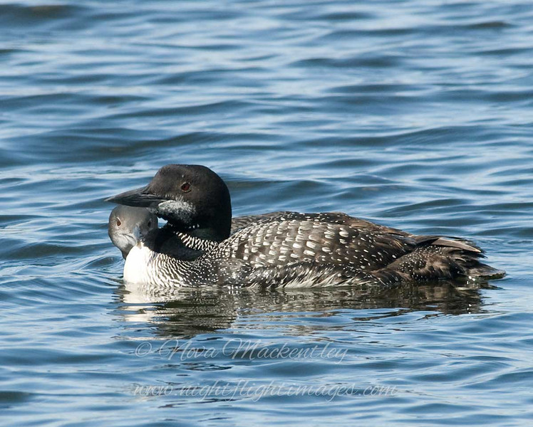 "Loon Family © 2008 Nova Mackentley Seney NWR, MI LOF  <div class=""ss-paypal-button""><div class=""ss-paypal-add-to-cart-section""><div class=""ss-paypal-product-options""><h4>Mat Sizes</h4><ul><li><a href=""https://www.paypal.com/cgi-bin/webscr?cmd=_cart&business=T77V5VKCW4K2U&lc=US&item_name=Loon%20Family%20%C2%A9%202008%20Nova%20Mackentley%20Seney%20NWR%2C%20MI%20LOF&item_number=http%3A%2F%2Fwww.nightflightimages.com%2FGalleries-1%2FUpper-Peninsula-of-MI%2Fi-Np6n495&button_subtype=products&no_note=0&cn=Add%20special%20instructions%20to%20the%20seller%3A&no_shipping=2&currency_code=USD&weight_unit=lbs&add=1&bn=PP-ShopCartBF%3Abtn_cart_SM.gif%3ANonHosted&on0=Mat%20Sizes&option_select0=5%20x%207&option_amount0=10.00&option_select1=8%20x%2010&option_amount1=18.00&option_select2=11%20x%2014&option_amount2=28.00&option_select3=card&option_amount3=4.00&option_index=0&charset=utf-8&submit=&os0=5%20x%207"" target=""paypal""><span>5 x 7 $11.00 USD</span><img src=""https://www.paypalobjects.com/en_US/i/btn/btn_cart_SM.gif""></a></li><li><a href=""https://www.paypal.com/cgi-bin/webscr?cmd=_cart&business=T77V5VKCW4K2U&lc=US&item_name=Loon%20Family%20%C2%A9%202008%20Nova%20Mackentley%20Seney%20NWR%2C%20MI%20LOF&item_number=http%3A%2F%2Fwww.nightflightimages.com%2FGalleries-1%2FUpper-Peninsula-of-MI%2Fi-Np6n495&button_subtype=products&no_note=0&cn=Add%20special%20instructions%20to%20the%20seller%3A&no_shipping=2&currency_code=USD&weight_unit=lbs&add=1&bn=PP-ShopCartBF%3Abtn_cart_SM.gif%3ANonHosted&on0=Mat%20Sizes&option_select0=5%20x%207&option_amount0=10.00&option_select1=8%20x%2010&option_amount1=18.00&option_select2=11%20x%2014&option_amount2=28.00&option_select3=card&option_amount3=4.00&option_index=0&charset=utf-8&submit=&os0=8%20x%2010"" target=""paypal""><span>8 x 10 $19.00 USD</span><img src=""https://www.paypalobjects.com/en_US/i/btn/btn_cart_SM.gif""></a></li><li><a href=""https://www.paypal.com/cgi-bin/webscr?cmd=_cart&business=T77V5VKCW4K2U&lc=US&item_name=Loon%20Family%20%C2%A9%202008%20Nova%20Mackentley%20Seney%20NWR%2C%20MI%20LOF&item_number=http%3A%2F%2Fwww.nightflightimages.com%2FGalleries-1%2FUpper-Peninsula-of-MI%2Fi-Np6n495&button_subtype=products&no_note=0&cn=Add%20special%20instructions%20to%20the%20seller%3A&no_shipping=2&currency_code=USD&weight_unit=lbs&add=1&bn=PP-ShopCartBF%3Abtn_cart_SM.gif%3ANonHosted&on0=Mat%20Sizes&option_select0=5%20x%207&option_amount0=10.00&option_select1=8%20x%2010&option_amount1=18.00&option_select2=11%20x%2014&option_amount2=28.00&option_select3=card&option_amount3=4.00&option_index=0&charset=utf-8&submit=&os0=11%20x%2014"" target=""paypal""><span>11 x 14 $29.00 USD</span><img src=""https://www.paypalobjects.com/en_US/i/btn/btn_cart_SM.gif""></a></li><li><a href=""https://www.paypal.com/cgi-bin/webscr?cmd=_cart&business=T77V5VKCW4K2U&lc=US&item_name=Loon%20Family%20%C2%A9%202008%20Nova%20Mackentley%20Seney%20NWR%2C%20MI%20LOF&item_number=http%3A%2F%2Fwww.nightflightimages.com%2FGalleries-1%2FUpper-Peninsula-of-MI%2Fi-Np6n495&button_subtype=products&no_note=0&cn=Add%20special%20instructions%20to%20the%20seller%3A&no_shipping=2&currency_code=USD&weight_unit=lbs&add=1&bn=PP-ShopCartBF%3Abtn_cart_SM.gif%3ANonHosted&on0=Mat%20Sizes&option_select0=5%20x%207&option_amount0=10.00&option_select1=8%20x%2010&option_amount1=18.00&option_select2=11%20x%2014&option_amount2=28.00&option_select3=card&option_amount3=4.00&option_index=0&charset=utf-8&submit=&os0=card"" target=""paypal""><span>card $5.00 USD</span><img src=""https://www.paypalobjects.com/en_US/i/btn/btn_cart_SM.gif""></a></li></ul></div></div> <div class=""ss-paypal-view-cart-section""><a href=""https://www.paypal.com/cgi-bin/webscr?cmd=_cart&business=T77V5VKCW4K2U&display=1&item_name=Loon%20Family%20%C2%A9%202008%20Nova%20Mackentley%20Seney%20NWR%2C%20MI%20LOF&item_number=http%3A%2F%2Fwww.nightflightimages.com%2FGalleries-1%2FUpper-Peninsula-of-MI%2Fi-Np6n495&charset=utf-8&submit="" target=""paypal"" class=""ss-paypal-submit-button""><img src=""https://www.paypalobjects.com/en_US/i/btn/btn_viewcart_LG.gif""></a></div></div><div class=""ss-paypal-button-end""></div>"