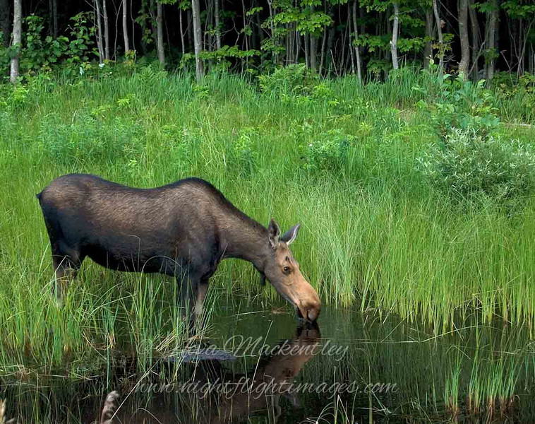 "Moose at Rivermouth © 2009 Nova Mackentley Tahquamenon Rivermouth, MI MAR  <div class=""ss-paypal-button""><div class=""ss-paypal-add-to-cart-section""><div class=""ss-paypal-product-options""><h4>Mat Sizes</h4><ul><li><a href=""https://www.paypal.com/cgi-bin/webscr?cmd=_cart&amp;business=T77V5VKCW4K2U&amp;lc=US&amp;item_name=Moose%20at%20Rivermouth%20%C2%A9%202009%20Nova%20Mackentley%20Tahquamenon%20Rivermouth%2C%20MI%20MAR&amp;item_number=http%3A%2F%2Fwww.nightflightimages.com%2FGalleries-1%2FMammals%2Fi-NqThfWr&amp;button_subtype=products&amp;no_note=0&amp;cn=Add%20special%20instructions%20to%20the%20seller%3A&amp;no_shipping=2&amp;currency_code=USD&amp;weight_unit=lbs&amp;add=1&amp;bn=PP-ShopCartBF%3Abtn_cart_SM.gif%3ANonHosted&amp;on0=Mat%20Sizes&amp;option_select0=5%20x%207&amp;option_amount0=10.00&amp;option_select1=8%20x%2010&amp;option_amount1=18.00&amp;option_select2=11%20x%2014&amp;option_amount2=28.00&amp;option_select3=card&amp;option_amount3=4.00&amp;option_index=0&amp;charset=utf-8&amp;submit=&amp;os0=5%20x%207"" target=""paypal""><span>5 x 7 $11.00 USD</span><img src=""https://www.paypalobjects.com/en_US/i/btn/btn_cart_SM.gif""></a></li><li><a href=""https://www.paypal.com/cgi-bin/webscr?cmd=_cart&amp;business=T77V5VKCW4K2U&amp;lc=US&amp;item_name=Moose%20at%20Rivermouth%20%C2%A9%202009%20Nova%20Mackentley%20Tahquamenon%20Rivermouth%2C%20MI%20MAR&amp;item_number=http%3A%2F%2Fwww.nightflightimages.com%2FGalleries-1%2FMammals%2Fi-NqThfWr&amp;button_subtype=products&amp;no_note=0&amp;cn=Add%20special%20instructions%20to%20the%20seller%3A&amp;no_shipping=2&amp;currency_code=USD&amp;weight_unit=lbs&amp;add=1&amp;bn=PP-ShopCartBF%3Abtn_cart_SM.gif%3ANonHosted&amp;on0=Mat%20Sizes&amp;option_select0=5%20x%207&amp;option_amount0=10.00&amp;option_select1=8%20x%2010&amp;option_amount1=18.00&amp;option_select2=11%20x%2014&amp;option_amount2=28.00&amp;option_select3=card&amp;option_amount3=4.00&amp;option_index=0&amp;charset=utf-8&amp;submit=&amp;os0=8%20x%2010"" target=""paypal""><span>8 x 10 $19.00 USD</span><img src=""https://www.paypalobjects.com/en_US/i/btn/btn_cart_SM.gif""></a></li><li><a href=""https://www.paypal.com/cgi-bin/webscr?cmd=_cart&amp;business=T77V5VKCW4K2U&amp;lc=US&amp;item_name=Moose%20at%20Rivermouth%20%C2%A9%202009%20Nova%20Mackentley%20Tahquamenon%20Rivermouth%2C%20MI%20MAR&amp;item_number=http%3A%2F%2Fwww.nightflightimages.com%2FGalleries-1%2FMammals%2Fi-NqThfWr&amp;button_subtype=products&amp;no_note=0&amp;cn=Add%20special%20instructions%20to%20the%20seller%3A&amp;no_shipping=2&amp;currency_code=USD&amp;weight_unit=lbs&amp;add=1&amp;bn=PP-ShopCartBF%3Abtn_cart_SM.gif%3ANonHosted&amp;on0=Mat%20Sizes&amp;option_select0=5%20x%207&amp;option_amount0=10.00&amp;option_select1=8%20x%2010&amp;option_amount1=18.00&amp;option_select2=11%20x%2014&amp;option_amount2=28.00&amp;option_select3=card&amp;option_amount3=4.00&amp;option_index=0&amp;charset=utf-8&amp;submit=&amp;os0=11%20x%2014"" target=""paypal""><span>11 x 14 $29.00 USD</span><img src=""https://www.paypalobjects.com/en_US/i/btn/btn_cart_SM.gif""></a></li><li><a href=""https://www.paypal.com/cgi-bin/webscr?cmd=_cart&amp;business=T77V5VKCW4K2U&amp;lc=US&amp;item_name=Moose%20at%20Rivermouth%20%C2%A9%202009%20Nova%20Mackentley%20Tahquamenon%20Rivermouth%2C%20MI%20MAR&amp;item_number=http%3A%2F%2Fwww.nightflightimages.com%2FGalleries-1%2FMammals%2Fi-NqThfWr&amp;button_subtype=products&amp;no_note=0&amp;cn=Add%20special%20instructions%20to%20the%20seller%3A&amp;no_shipping=2&amp;currency_code=USD&amp;weight_unit=lbs&amp;add=1&amp;bn=PP-ShopCartBF%3Abtn_cart_SM.gif%3ANonHosted&amp;on0=Mat%20Sizes&amp;option_select0=5%20x%207&amp;option_amount0=10.00&amp;option_select1=8%20x%2010&amp;option_amount1=18.00&amp;option_select2=11%20x%2014&amp;option_amount2=28.00&amp;option_select3=card&amp;option_amount3=4.00&amp;option_index=0&amp;charset=utf-8&amp;submit=&amp;os0=card"" target=""paypal""><span>card $5.00 USD</span><img src=""https://www.paypalobjects.com/en_US/i/btn/btn_cart_SM.gif""></a></li></ul></div></div> <div class=""ss-paypal-view-cart-section""><a href=""https://www.paypal.com/cgi-bin/webscr?cmd=_cart&amp;business=T77V5VKCW4K2U&amp;display=1&amp;item_name=Moose%20at%20Rivermouth%20%C2%A9%202009%20Nova%20Mackentley%20Tahquamenon%20Rivermouth%2C%20MI%20MAR&amp;item_number=http%3A%2F%2Fwww.nightflightimages.com%2FGalleries-1%2FMammals%2Fi-NqThfWr&amp;charset=utf-8&amp;submit="" target=""paypal"" class=""ss-paypal-submit-button""><img src=""https://www.paypalobjects.com/en_US/i/btn/btn_viewcart_LG.gif""></a></div></div><div class=""ss-paypal-button-end""></div>"