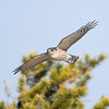 "Sharp-shinned Hawk  © 2011 C. M. Neri.  Whitefish Point, MI SSHAWP  <div class=""ss-paypal-button""><div class=""ss-paypal-add-to-cart-section""><div class=""ss-paypal-product-options""><h4>Mat Sizes</h4><ul><li><a href=""https://www.paypal.com/cgi-bin/webscr?cmd=_cart&amp;business=T77V5VKCW4K2U&amp;lc=US&amp;item_name=Sharp-shinned%20Hawk%20%20%C2%A9%202011%20C.%20M.%20Neri.%20%20Whitefish%20Point%2C%20MI%20SSHAWP&amp;item_number=http%3A%2F%2Fwww.nightflightimages.com%2FGalleries-1%2FHawks%2Fi-QQRvJ3w&amp;button_subtype=products&amp;no_note=0&amp;cn=Add%20special%20instructions%20to%20the%20seller%3A&amp;no_shipping=2&amp;currency_code=USD&amp;weight_unit=lbs&amp;add=1&amp;bn=PP-ShopCartBF%3Abtn_cart_SM.gif%3ANonHosted&amp;on0=Mat%20Sizes&amp;option_select0=5%20x%207&amp;option_amount0=10.00&amp;option_select1=8%20x%2010&amp;option_amount1=18.00&amp;option_select2=11%20x%2014&amp;option_amount2=28.00&amp;option_select3=card&amp;option_amount3=4.00&amp;option_index=0&amp;charset=utf-8&amp;submit=&amp;os0=5%20x%207"" target=""paypal""><span>5 x 7 $11.00 USD</span><img src=""https://www.paypalobjects.com/en_US/i/btn/btn_cart_SM.gif""></a></li><li><a href=""https://www.paypal.com/cgi-bin/webscr?cmd=_cart&amp;business=T77V5VKCW4K2U&amp;lc=US&amp;item_name=Sharp-shinned%20Hawk%20%20%C2%A9%202011%20C.%20M.%20Neri.%20%20Whitefish%20Point%2C%20MI%20SSHAWP&amp;item_number=http%3A%2F%2Fwww.nightflightimages.com%2FGalleries-1%2FHawks%2Fi-QQRvJ3w&amp;button_subtype=products&amp;no_note=0&amp;cn=Add%20special%20instructions%20to%20the%20seller%3A&amp;no_shipping=2&amp;currency_code=USD&amp;weight_unit=lbs&amp;add=1&amp;bn=PP-ShopCartBF%3Abtn_cart_SM.gif%3ANonHosted&amp;on0=Mat%20Sizes&amp;option_select0=5%20x%207&amp;option_amount0=10.00&amp;option_select1=8%20x%2010&amp;option_amount1=18.00&amp;option_select2=11%20x%2014&amp;option_amount2=28.00&amp;option_select3=card&amp;option_amount3=4.00&amp;option_index=0&amp;charset=utf-8&amp;submit=&amp;os0=8%20x%2010"" target=""paypal""><span>8 x 10 $19.00 USD</span><img src=""https://www.paypalobjects.com/en_US/i/btn/btn_cart_SM.gif""></a></li><li><a href=""https://www.paypal.com/cgi-bin/webscr?cmd=_cart&amp;business=T77V5VKCW4K2U&amp;lc=US&amp;item_name=Sharp-shinned%20Hawk%20%20%C2%A9%202011%20C.%20M.%20Neri.%20%20Whitefish%20Point%2C%20MI%20SSHAWP&amp;item_number=http%3A%2F%2Fwww.nightflightimages.com%2FGalleries-1%2FHawks%2Fi-QQRvJ3w&amp;button_subtype=products&amp;no_note=0&amp;cn=Add%20special%20instructions%20to%20the%20seller%3A&amp;no_shipping=2&amp;currency_code=USD&amp;weight_unit=lbs&amp;add=1&amp;bn=PP-ShopCartBF%3Abtn_cart_SM.gif%3ANonHosted&amp;on0=Mat%20Sizes&amp;option_select0=5%20x%207&amp;option_amount0=10.00&amp;option_select1=8%20x%2010&amp;option_amount1=18.00&amp;option_select2=11%20x%2014&amp;option_amount2=28.00&amp;option_select3=card&amp;option_amount3=4.00&amp;option_index=0&amp;charset=utf-8&amp;submit=&amp;os0=11%20x%2014"" target=""paypal""><span>11 x 14 $29.00 USD</span><img src=""https://www.paypalobjects.com/en_US/i/btn/btn_cart_SM.gif""></a></li><li><a href=""https://www.paypal.com/cgi-bin/webscr?cmd=_cart&amp;business=T77V5VKCW4K2U&amp;lc=US&amp;item_name=Sharp-shinned%20Hawk%20%20%C2%A9%202011%20C.%20M.%20Neri.%20%20Whitefish%20Point%2C%20MI%20SSHAWP&amp;item_number=http%3A%2F%2Fwww.nightflightimages.com%2FGalleries-1%2FHawks%2Fi-QQRvJ3w&amp;button_subtype=products&amp;no_note=0&amp;cn=Add%20special%20instructions%20to%20the%20seller%3A&amp;no_shipping=2&amp;currency_code=USD&amp;weight_unit=lbs&amp;add=1&amp;bn=PP-ShopCartBF%3Abtn_cart_SM.gif%3ANonHosted&amp;on0=Mat%20Sizes&amp;option_select0=5%20x%207&amp;option_amount0=10.00&amp;option_select1=8%20x%2010&amp;option_amount1=18.00&amp;option_select2=11%20x%2014&amp;option_amount2=28.00&amp;option_select3=card&amp;option_amount3=4.00&amp;option_index=0&amp;charset=utf-8&amp;submit=&amp;os0=card"" target=""paypal""><span>card $5.00 USD</span><img src=""https://www.paypalobjects.com/en_US/i/btn/btn_cart_SM.gif""></a></li></ul></div></div> <div class=""ss-paypal-view-cart-section""><a href=""https://www.paypal.com/cgi-bin/webscr?cmd=_cart&amp;business=T77V5VKCW4K2U&amp;display=1&amp;item_name=Sharp-shinned%20Hawk%20%20%C2%A9%202011%20C.%20M.%20Neri.%20%20Whitefish%20Point%2C%20MI%20SSHAWP&amp;item_number=http%3A%2F%2Fwww.nightflightimages.com%2FGalleries-1%2FHawks%2Fi-QQRvJ3w&amp;charset=utf-8&amp;submit="" target=""paypal"" class=""ss-paypal-submit-button""><img src=""https://www.paypalobjects.com/en_US/i/btn/btn_viewcart_LG.gif""></a></div></div><div class=""ss-paypal-button-end""></div>"
