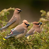 """Cedar Waxwings © 2015 Chris M Neri Whitefish Point, MI 3CEDW  <div class=""""ss-paypal-button""""><div class=""""ss-paypal-add-to-cart-section""""><div class=""""ss-paypal-product-options""""><h4>Mat Sizes</h4><ul><li><a href=""""https://www.paypal.com/cgi-bin/webscr?cmd=_cart&business=T77V5VKCW4K2U&lc=US&item_name=Cedar%20Waxwings%20%C2%A9%202015%20Chris%20M%20Neri%20Whitefish%20Point%2C%20MI%203CEDW&item_number=http%3A%2F%2Fwww.nightflightimages.com%2FGalleries-1%2FNew%2Fi-QdvZCzZ&button_subtype=products&no_note=0&cn=Add%20special%20instructions%20to%20the%20seller%3A&no_shipping=2&currency_code=USD&weight_unit=lbs&add=1&bn=PP-ShopCartBF%3Abtn_cart_SM.gif%3ANonHosted&on0=Mat%20Sizes&option_select0=5%20x%207&option_amount0=12.00&option_select1=8%20x%2010&option_amount1=19.00&option_select2=11%20x%2014&option_amount2=29.00&option_select3=card&option_amount3=5.00&option_index=0&charset=utf-8&submit=&os0=5%20x%207"""" target=""""paypal""""><span>5 x 7 $12.00 USD</span><img src=""""https://www.paypalobjects.com/en_US/i/btn/btn_cart_SM.gif""""></a></li><li><a href=""""https://www.paypal.com/cgi-bin/webscr?cmd=_cart&business=T77V5VKCW4K2U&lc=US&item_name=Cedar%20Waxwings%20%C2%A9%202015%20Chris%20M%20Neri%20Whitefish%20Point%2C%20MI%203CEDW&item_number=http%3A%2F%2Fwww.nightflightimages.com%2FGalleries-1%2FNew%2Fi-QdvZCzZ&button_subtype=products&no_note=0&cn=Add%20special%20instructions%20to%20the%20seller%3A&no_shipping=2&currency_code=USD&weight_unit=lbs&add=1&bn=PP-ShopCartBF%3Abtn_cart_SM.gif%3ANonHosted&on0=Mat%20Sizes&option_select0=5%20x%207&option_amount0=12.00&option_select1=8%20x%2010&option_amount1=19.00&option_select2=11%20x%2014&option_amount2=29.00&option_select3=card&option_amount3=5.00&option_index=0&charset=utf-8&submit=&os0=8%20x%2010"""" target=""""paypal""""><span>8 x 10 $19.00 USD</span><img src=""""https://www.paypalobjects.com/en_US/i/btn/btn_cart_SM.gif""""></a></li><li><a href=""""https://www.paypal.com/cgi-bin/webscr?cmd=_cart&business=T77V5VKCW4K2U&lc=US&item_name=Cedar%20Waxwings%20%C2%A9%202015%20C"""