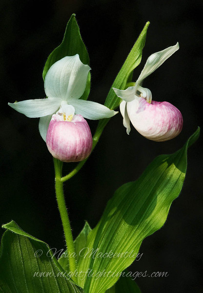 "Showy Lady Slippers © 2008 Nova Mackentley Eastern U.P., MI SLS  <div class=""ss-paypal-button""><div class=""ss-paypal-add-to-cart-section""><div class=""ss-paypal-product-options""><h4>Mat Sizes</h4><ul><li><a href=""https://www.paypal.com/cgi-bin/webscr?cmd=_cart&business=T77V5VKCW4K2U&lc=US&item_name=Showy%20Lady%20Slippers%20%C2%A9%202008%20Nova%20Mackentley%20Eastern%20U.P.%2C%20MI%20SLS&item_number=http%3A%2F%2Fwww.nightflightimages.com%2FGalleries-1%2FUpper-Peninsula-of-MI%2Fi-R5x2xgM&button_subtype=products&no_note=0&cn=Add%20special%20instructions%20to%20the%20seller%3A&no_shipping=2&currency_code=USD&weight_unit=lbs&add=1&bn=PP-ShopCartBF%3Abtn_cart_SM.gif%3ANonHosted&on0=Mat%20Sizes&option_select0=5%20x%207&option_amount0=10.00&option_select1=8%20x%2010&option_amount1=18.00&option_select2=11%20x%2014&option_amount2=28.00&option_select3=card&option_amount3=4.00&option_index=0&charset=utf-8&submit=&os0=5%20x%207"" target=""paypal""><span>5 x 7 $11.00 USD</span><img src=""https://www.paypalobjects.com/en_US/i/btn/btn_cart_SM.gif""></a></li><li><a href=""https://www.paypal.com/cgi-bin/webscr?cmd=_cart&business=T77V5VKCW4K2U&lc=US&item_name=Showy%20Lady%20Slippers%20%C2%A9%202008%20Nova%20Mackentley%20Eastern%20U.P.%2C%20MI%20SLS&item_number=http%3A%2F%2Fwww.nightflightimages.com%2FGalleries-1%2FUpper-Peninsula-of-MI%2Fi-R5x2xgM&button_subtype=products&no_note=0&cn=Add%20special%20instructions%20to%20the%20seller%3A&no_shipping=2&currency_code=USD&weight_unit=lbs&add=1&bn=PP-ShopCartBF%3Abtn_cart_SM.gif%3ANonHosted&on0=Mat%20Sizes&option_select0=5%20x%207&option_amount0=10.00&option_select1=8%20x%2010&option_amount1=18.00&option_select2=11%20x%2014&option_amount2=28.00&option_select3=card&option_amount3=4.00&option_index=0&charset=utf-8&submit=&os0=8%20x%2010"" target=""paypal""><span>8 x 10 $19.00 USD</span><img src=""https://www.paypalobjects.com/en_US/i/btn/btn_cart_SM.gif""></a></li><li><a href=""https://www.paypal.com/cgi-bin/webscr?cmd=_cart&business=T77V5VKCW4K2U&lc=US&item_name=Showy%20Lady%20Slippers%20%C2%A9%202008%20Nova%20Mackentley%20Eastern%20U.P.%2C%20MI%20SLS&item_number=http%3A%2F%2Fwww.nightflightimages.com%2FGalleries-1%2FUpper-Peninsula-of-MI%2Fi-R5x2xgM&button_subtype=products&no_note=0&cn=Add%20special%20instructions%20to%20the%20seller%3A&no_shipping=2&currency_code=USD&weight_unit=lbs&add=1&bn=PP-ShopCartBF%3Abtn_cart_SM.gif%3ANonHosted&on0=Mat%20Sizes&option_select0=5%20x%207&option_amount0=10.00&option_select1=8%20x%2010&option_amount1=18.00&option_select2=11%20x%2014&option_amount2=28.00&option_select3=card&option_amount3=4.00&option_index=0&charset=utf-8&submit=&os0=11%20x%2014"" target=""paypal""><span>11 x 14 $29.00 USD</span><img src=""https://www.paypalobjects.com/en_US/i/btn/btn_cart_SM.gif""></a></li><li><a href=""https://www.paypal.com/cgi-bin/webscr?cmd=_cart&business=T77V5VKCW4K2U&lc=US&item_name=Showy%20Lady%20Slippers%20%C2%A9%202008%20Nova%20Mackentley%20Eastern%20U.P.%2C%20MI%20SLS&item_number=http%3A%2F%2Fwww.nightflightimages.com%2FGalleries-1%2FUpper-Peninsula-of-MI%2Fi-R5x2xgM&button_subtype=products&no_note=0&cn=Add%20special%20instructions%20to%20the%20seller%3A&no_shipping=2&currency_code=USD&weight_unit=lbs&add=1&bn=PP-ShopCartBF%3Abtn_cart_SM.gif%3ANonHosted&on0=Mat%20Sizes&option_select0=5%20x%207&option_amount0=10.00&option_select1=8%20x%2010&option_amount1=18.00&option_select2=11%20x%2014&option_amount2=28.00&option_select3=card&option_amount3=4.00&option_index=0&charset=utf-8&submit=&os0=card"" target=""paypal""><span>card $5.00 USD</span><img src=""https://www.paypalobjects.com/en_US/i/btn/btn_cart_SM.gif""></a></li></ul></div></div> <div class=""ss-paypal-view-cart-section""><a href=""https://www.paypal.com/cgi-bin/webscr?cmd=_cart&business=T77V5VKCW4K2U&display=1&item_name=Showy%20Lady%20Slippers%20%C2%A9%202008%20Nova%20Mackentley%20Eastern%20U.P.%2C%20MI%20SLS&item_number=http%3A%2F%2Fwww.nightflightimages.com%2FGalleries-1%2FUpper-Peninsula-of-MI%2Fi-R5x2xgM&charset=utf-8&submit="" target=""paypal"" class=""ss-paypal-submit-button""><img src=""https://www.paypalobjects.com/en_US/i/btn/btn_viewcart_LG.gif""></a></div></div><div class=""ss-paypal-button-end""></div>"