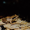 "Wood Frog  © 2001 C. M. Neri Northern MI WFROG  <div class=""ss-paypal-button""><div class=""ss-paypal-add-to-cart-section""><div class=""ss-paypal-product-options""><h4>Mat Sizes</h4><ul><li><a href=""https://www.paypal.com/cgi-bin/webscr?cmd=_cart&business=T77V5VKCW4K2U&lc=US&item_name=Wood%20Frog%20%20%C2%A9%202001%20C.%20M.%20Neri%20Northern%20MI%20WFROG&item_number=http%3A%2F%2Fwww.nightflightimages.com%2FGalleries-1%2FUpper-Peninsula-of-MI%2Fi-RSvkkkC&button_subtype=products&no_note=0&cn=Add%20special%20instructions%20to%20the%20seller%3A&no_shipping=2&currency_code=USD&weight_unit=lbs&add=1&bn=PP-ShopCartBF%3Abtn_cart_SM.gif%3ANonHosted&on0=Mat%20Sizes&option_select0=5%20x%207&option_amount0=10.00&option_select1=8%20x%2010&option_amount1=18.00&option_select2=11%20x%2014&option_amount2=28.00&option_select3=card&option_amount3=4.00&option_index=0&charset=utf-8&submit=&os0=5%20x%207"" target=""paypal""><span>5 x 7 $11.00 USD</span><img src=""https://www.paypalobjects.com/en_US/i/btn/btn_cart_SM.gif""></a></li><li><a href=""https://www.paypal.com/cgi-bin/webscr?cmd=_cart&business=T77V5VKCW4K2U&lc=US&item_name=Wood%20Frog%20%20%C2%A9%202001%20C.%20M.%20Neri%20Northern%20MI%20WFROG&item_number=http%3A%2F%2Fwww.nightflightimages.com%2FGalleries-1%2FUpper-Peninsula-of-MI%2Fi-RSvkkkC&button_subtype=products&no_note=0&cn=Add%20special%20instructions%20to%20the%20seller%3A&no_shipping=2&currency_code=USD&weight_unit=lbs&add=1&bn=PP-ShopCartBF%3Abtn_cart_SM.gif%3ANonHosted&on0=Mat%20Sizes&option_select0=5%20x%207&option_amount0=10.00&option_select1=8%20x%2010&option_amount1=18.00&option_select2=11%20x%2014&option_amount2=28.00&option_select3=card&option_amount3=4.00&option_index=0&charset=utf-8&submit=&os0=8%20x%2010"" target=""paypal""><span>8 x 10 $19.00 USD</span><img src=""https://www.paypalobjects.com/en_US/i/btn/btn_cart_SM.gif""></a></li><li><a href=""https://www.paypal.com/cgi-bin/webscr?cmd=_cart&business=T77V5VKCW4K2U&lc=US&item_name=Wood%20Frog%20%20%C2%A9%202001%20C.%20M.%20Neri%20Northern%20MI%20WFROG&item_number=http%3A%2F%2Fwww.nightflightimages.com%2FGalleries-1%2FUpper-Peninsula-of-MI%2Fi-RSvkkkC&button_subtype=products&no_note=0&cn=Add%20special%20instructions%20to%20the%20seller%3A&no_shipping=2&currency_code=USD&weight_unit=lbs&add=1&bn=PP-ShopCartBF%3Abtn_cart_SM.gif%3ANonHosted&on0=Mat%20Sizes&option_select0=5%20x%207&option_amount0=10.00&option_select1=8%20x%2010&option_amount1=18.00&option_select2=11%20x%2014&option_amount2=28.00&option_select3=card&option_amount3=4.00&option_index=0&charset=utf-8&submit=&os0=11%20x%2014"" target=""paypal""><span>11 x 14 $29.00 USD</span><img src=""https://www.paypalobjects.com/en_US/i/btn/btn_cart_SM.gif""></a></li><li><a href=""https://www.paypal.com/cgi-bin/webscr?cmd=_cart&business=T77V5VKCW4K2U&lc=US&item_name=Wood%20Frog%20%20%C2%A9%202001%20C.%20M.%20Neri%20Northern%20MI%20WFROG&item_number=http%3A%2F%2Fwww.nightflightimages.com%2FGalleries-1%2FUpper-Peninsula-of-MI%2Fi-RSvkkkC&button_subtype=products&no_note=0&cn=Add%20special%20instructions%20to%20the%20seller%3A&no_shipping=2&currency_code=USD&weight_unit=lbs&add=1&bn=PP-ShopCartBF%3Abtn_cart_SM.gif%3ANonHosted&on0=Mat%20Sizes&option_select0=5%20x%207&option_amount0=10.00&option_select1=8%20x%2010&option_amount1=18.00&option_select2=11%20x%2014&option_amount2=28.00&option_select3=card&option_amount3=4.00&option_index=0&charset=utf-8&submit=&os0=card"" target=""paypal""><span>card $5.00 USD</span><img src=""https://www.paypalobjects.com/en_US/i/btn/btn_cart_SM.gif""></a></li></ul></div></div> <div class=""ss-paypal-view-cart-section""><a href=""https://www.paypal.com/cgi-bin/webscr?cmd=_cart&business=T77V5VKCW4K2U&display=1&item_name=Wood%20Frog%20%20%C2%A9%202001%20C.%20M.%20Neri%20Northern%20MI%20WFROG&item_number=http%3A%2F%2Fwww.nightflightimages.com%2FGalleries-1%2FUpper-Peninsula-of-MI%2Fi-RSvkkkC&charset=utf-8&submit="" target=""paypal"" class=""ss-paypal-submit-button""><img src=""https://www.paypalobjects.com/en_US/i/btn/btn_viewcart_LG.gif""></a></div></div><div class=""ss-paypal-button-end""></div>"