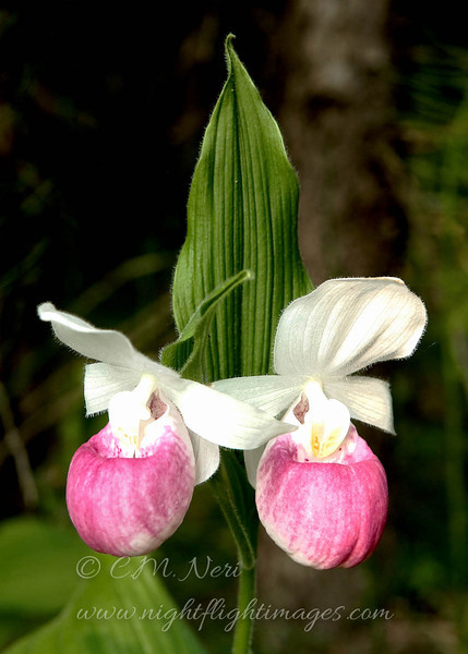 "Showy Ladyslipper © 2008 C. M. Neri Luce County, MI SLDYDLP  <div class=""ss-paypal-button""><div class=""ss-paypal-add-to-cart-section""><div class=""ss-paypal-product-options""><h4>Mat Sizes</h4><ul><li><a href=""https://www.paypal.com/cgi-bin/webscr?cmd=_cart&amp;business=T77V5VKCW4K2U&amp;lc=US&amp;item_name=Showy%20Ladyslipper%20%C2%A9%202008%20C.%20M.%20Neri%20Luce%20County%2C%20MI%20SLDYDLP&amp;item_number=http%3A%2F%2Fwww.nightflightimages.com%2FGalleries-1%2FUpper-Peninsula-of-MI%2Fi-S84pz5X&amp;button_subtype=products&amp;no_note=0&amp;cn=Add%20special%20instructions%20to%20the%20seller%3A&amp;no_shipping=2&amp;currency_code=USD&amp;weight_unit=lbs&amp;add=1&amp;bn=PP-ShopCartBF%3Abtn_cart_SM.gif%3ANonHosted&amp;on0=Mat%20Sizes&amp;option_select0=5%20x%207&amp;option_amount0=10.00&amp;option_select1=8%20x%2010&amp;option_amount1=18.00&amp;option_select2=11%20x%2014&amp;option_amount2=28.00&amp;option_select3=card&amp;option_amount3=4.00&amp;option_index=0&amp;charset=utf-8&amp;submit=&amp;os0=5%20x%207"" target=""paypal""><span>5 x 7 $11.00 USD</span><img src=""https://www.paypalobjects.com/en_US/i/btn/btn_cart_SM.gif""></a></li><li><a href=""https://www.paypal.com/cgi-bin/webscr?cmd=_cart&amp;business=T77V5VKCW4K2U&amp;lc=US&amp;item_name=Showy%20Ladyslipper%20%C2%A9%202008%20C.%20M.%20Neri%20Luce%20County%2C%20MI%20SLDYDLP&amp;item_number=http%3A%2F%2Fwww.nightflightimages.com%2FGalleries-1%2FUpper-Peninsula-of-MI%2Fi-S84pz5X&amp;button_subtype=products&amp;no_note=0&amp;cn=Add%20special%20instructions%20to%20the%20seller%3A&amp;no_shipping=2&amp;currency_code=USD&amp;weight_unit=lbs&amp;add=1&amp;bn=PP-ShopCartBF%3Abtn_cart_SM.gif%3ANonHosted&amp;on0=Mat%20Sizes&amp;option_select0=5%20x%207&amp;option_amount0=10.00&amp;option_select1=8%20x%2010&amp;option_amount1=18.00&amp;option_select2=11%20x%2014&amp;option_amount2=28.00&amp;option_select3=card&amp;option_amount3=4.00&amp;option_index=0&amp;charset=utf-8&amp;submit=&amp;os0=8%20x%2010"" target=""paypal""><span>8 x 10 $19.00 USD</span><img src=""https://www.paypalobjects.com/en_US/i/btn/btn_cart_SM.gif""></a></li><li><a href=""https://www.paypal.com/cgi-bin/webscr?cmd=_cart&amp;business=T77V5VKCW4K2U&amp;lc=US&amp;item_name=Showy%20Ladyslipper%20%C2%A9%202008%20C.%20M.%20Neri%20Luce%20County%2C%20MI%20SLDYDLP&amp;item_number=http%3A%2F%2Fwww.nightflightimages.com%2FGalleries-1%2FUpper-Peninsula-of-MI%2Fi-S84pz5X&amp;button_subtype=products&amp;no_note=0&amp;cn=Add%20special%20instructions%20to%20the%20seller%3A&amp;no_shipping=2&amp;currency_code=USD&amp;weight_unit=lbs&amp;add=1&amp;bn=PP-ShopCartBF%3Abtn_cart_SM.gif%3ANonHosted&amp;on0=Mat%20Sizes&amp;option_select0=5%20x%207&amp;option_amount0=10.00&amp;option_select1=8%20x%2010&amp;option_amount1=18.00&amp;option_select2=11%20x%2014&amp;option_amount2=28.00&amp;option_select3=card&amp;option_amount3=4.00&amp;option_index=0&amp;charset=utf-8&amp;submit=&amp;os0=11%20x%2014"" target=""paypal""><span>11 x 14 $29.00 USD</span><img src=""https://www.paypalobjects.com/en_US/i/btn/btn_cart_SM.gif""></a></li><li><a href=""https://www.paypal.com/cgi-bin/webscr?cmd=_cart&amp;business=T77V5VKCW4K2U&amp;lc=US&amp;item_name=Showy%20Ladyslipper%20%C2%A9%202008%20C.%20M.%20Neri%20Luce%20County%2C%20MI%20SLDYDLP&amp;item_number=http%3A%2F%2Fwww.nightflightimages.com%2FGalleries-1%2FUpper-Peninsula-of-MI%2Fi-S84pz5X&amp;button_subtype=products&amp;no_note=0&amp;cn=Add%20special%20instructions%20to%20the%20seller%3A&amp;no_shipping=2&amp;currency_code=USD&amp;weight_unit=lbs&amp;add=1&amp;bn=PP-ShopCartBF%3Abtn_cart_SM.gif%3ANonHosted&amp;on0=Mat%20Sizes&amp;option_select0=5%20x%207&amp;option_amount0=10.00&amp;option_select1=8%20x%2010&amp;option_amount1=18.00&amp;option_select2=11%20x%2014&amp;option_amount2=28.00&amp;option_select3=card&amp;option_amount3=4.00&amp;option_index=0&amp;charset=utf-8&amp;submit=&amp;os0=card"" target=""paypal""><span>card $5.00 USD</span><img src=""https://www.paypalobjects.com/en_US/i/btn/btn_cart_SM.gif""></a></li></ul></div></div> <div class=""ss-paypal-view-cart-section""><a href=""https://www.paypal.com/cgi-bin/webscr?cmd=_cart&amp;business=T77V5VKCW4K2U&amp;display=1&amp;item_name=Showy%20Ladyslipper%20%C2%A9%202008%20C.%20M.%20Neri%20Luce%20County%2C%20MI%20SLDYDLP&amp;item_number=http%3A%2F%2Fwww.nightflightimages.com%2FGalleries-1%2FUpper-Peninsula-of-MI%2Fi-S84pz5X&amp;charset=utf-8&amp;submit="" target=""paypal"" class=""ss-paypal-submit-button""><img src=""https://www.paypalobjects.com/en_US/i/btn/btn_viewcart_LG.gif""></a></div></div><div class=""ss-paypal-button-end""></div>"