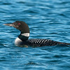 "Common Loon © 2013 C. M. Neri Whitefish Point, MI COLO  <div class=""ss-paypal-button""><div class=""ss-paypal-add-to-cart-section""><div class=""ss-paypal-product-options""><h4>Mat Sizes</h4><ul><li><a href=""https://www.paypal.com/cgi-bin/webscr?cmd=_cart&amp;business=T77V5VKCW4K2U&amp;lc=US&amp;item_name=Common%20Loon%20%C2%A9%202013%20C.%20M.%20Neri%20Whitefish%20Point%2C%20MI%20COLO&amp;item_number=http%3A%2F%2Fwww.nightflightimages.com%2FGalleries-1%2FUpper-Peninsula-of-MI%2Fi-SPLmpNB&amp;button_subtype=products&amp;no_note=0&amp;cn=Add%20special%20instructions%20to%20the%20seller%3A&amp;no_shipping=2&amp;currency_code=USD&amp;weight_unit=lbs&amp;add=1&amp;bn=PP-ShopCartBF%3Abtn_cart_SM.gif%3ANonHosted&amp;on0=Mat%20Sizes&amp;option_select0=5%20x%207&amp;option_amount0=10.00&amp;option_select1=8%20x%2010&amp;option_amount1=18.00&amp;option_select2=11%20x%2014&amp;option_amount2=28.00&amp;option_select3=card&amp;option_amount3=4.00&amp;option_index=0&amp;charset=utf-8&amp;submit=&amp;os0=5%20x%207"" target=""paypal""><span>5 x 7 $11.00 USD</span><img src=""https://www.paypalobjects.com/en_US/i/btn/btn_cart_SM.gif""></a></li><li><a href=""https://www.paypal.com/cgi-bin/webscr?cmd=_cart&amp;business=T77V5VKCW4K2U&amp;lc=US&amp;item_name=Common%20Loon%20%C2%A9%202013%20C.%20M.%20Neri%20Whitefish%20Point%2C%20MI%20COLO&amp;item_number=http%3A%2F%2Fwww.nightflightimages.com%2FGalleries-1%2FUpper-Peninsula-of-MI%2Fi-SPLmpNB&amp;button_subtype=products&amp;no_note=0&amp;cn=Add%20special%20instructions%20to%20the%20seller%3A&amp;no_shipping=2&amp;currency_code=USD&amp;weight_unit=lbs&amp;add=1&amp;bn=PP-ShopCartBF%3Abtn_cart_SM.gif%3ANonHosted&amp;on0=Mat%20Sizes&amp;option_select0=5%20x%207&amp;option_amount0=10.00&amp;option_select1=8%20x%2010&amp;option_amount1=18.00&amp;option_select2=11%20x%2014&amp;option_amount2=28.00&amp;option_select3=card&amp;option_amount3=4.00&amp;option_index=0&amp;charset=utf-8&amp;submit=&amp;os0=8%20x%2010"" target=""paypal""><span>8 x 10 $19.00 USD</span><img src=""https://www.paypalobjects.com/en_US/i/btn/btn_cart_SM.gif""></a></li><li><a href=""https://www.paypal.com/cgi-bin/webscr?cmd=_cart&amp;business=T77V5VKCW4K2U&amp;lc=US&amp;item_name=Common%20Loon%20%C2%A9%202013%20C.%20M.%20Neri%20Whitefish%20Point%2C%20MI%20COLO&amp;item_number=http%3A%2F%2Fwww.nightflightimages.com%2FGalleries-1%2FUpper-Peninsula-of-MI%2Fi-SPLmpNB&amp;button_subtype=products&amp;no_note=0&amp;cn=Add%20special%20instructions%20to%20the%20seller%3A&amp;no_shipping=2&amp;currency_code=USD&amp;weight_unit=lbs&amp;add=1&amp;bn=PP-ShopCartBF%3Abtn_cart_SM.gif%3ANonHosted&amp;on0=Mat%20Sizes&amp;option_select0=5%20x%207&amp;option_amount0=10.00&amp;option_select1=8%20x%2010&amp;option_amount1=18.00&amp;option_select2=11%20x%2014&amp;option_amount2=28.00&amp;option_select3=card&amp;option_amount3=4.00&amp;option_index=0&amp;charset=utf-8&amp;submit=&amp;os0=11%20x%2014"" target=""paypal""><span>11 x 14 $29.00 USD</span><img src=""https://www.paypalobjects.com/en_US/i/btn/btn_cart_SM.gif""></a></li><li><a href=""https://www.paypal.com/cgi-bin/webscr?cmd=_cart&amp;business=T77V5VKCW4K2U&amp;lc=US&amp;item_name=Common%20Loon%20%C2%A9%202013%20C.%20M.%20Neri%20Whitefish%20Point%2C%20MI%20COLO&amp;item_number=http%3A%2F%2Fwww.nightflightimages.com%2FGalleries-1%2FUpper-Peninsula-of-MI%2Fi-SPLmpNB&amp;button_subtype=products&amp;no_note=0&amp;cn=Add%20special%20instructions%20to%20the%20seller%3A&amp;no_shipping=2&amp;currency_code=USD&amp;weight_unit=lbs&amp;add=1&amp;bn=PP-ShopCartBF%3Abtn_cart_SM.gif%3ANonHosted&amp;on0=Mat%20Sizes&amp;option_select0=5%20x%207&amp;option_amount0=10.00&amp;option_select1=8%20x%2010&amp;option_amount1=18.00&amp;option_select2=11%20x%2014&amp;option_amount2=28.00&amp;option_select3=card&amp;option_amount3=4.00&amp;option_index=0&amp;charset=utf-8&amp;submit=&amp;os0=card"" target=""paypal""><span>card $5.00 USD</span><img src=""https://www.paypalobjects.com/en_US/i/btn/btn_cart_SM.gif""></a></li></ul></div></div> <div class=""ss-paypal-view-cart-section""><a href=""https://www.paypal.com/cgi-bin/webscr?cmd=_cart&amp;business=T77V5VKCW4K2U&amp;display=1&amp;item_name=Common%20Loon%20%C2%A9%202013%20C.%20M.%20Neri%20Whitefish%20Point%2C%20MI%20COLO&amp;item_number=http%3A%2F%2Fwww.nightflightimages.com%2FGalleries-1%2FUpper-Peninsula-of-MI%2Fi-SPLmpNB&amp;charset=utf-8&amp;submit="" target=""paypal"" class=""ss-paypal-submit-button""><img src=""https://www.paypalobjects.com/en_US/i/btn/btn_viewcart_LG.gif""></a></div></div><div class=""ss-paypal-button-end""></div>"