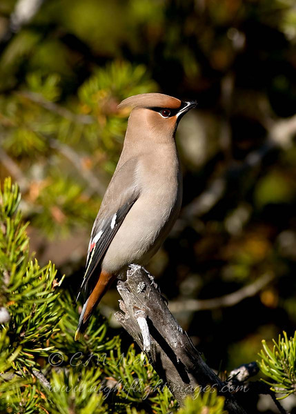 "Bohemian Waxwing © 2009 Chris M. Neri Whitefish Point, MI BOWA1  <div class=""ss-paypal-button""><div class=""ss-paypal-add-to-cart-section""><div class=""ss-paypal-product-options""><h4>Mat Sizes</h4><ul><li><a href=""https://www.paypal.com/cgi-bin/webscr?cmd=_cart&amp;business=T77V5VKCW4K2U&amp;lc=US&amp;item_name=Bohemian%20Waxwing%20%C2%A9%202009%20Chris%20M.%20Neri%20Whitefish%20Point%2C%20MI%20BOWA1&amp;item_number=http%3A%2F%2Fwww.nightflightimages.com%2FGalleries-1%2FUpper-Peninsula-of-MI%2Fi-SgdZcrq&amp;button_subtype=products&amp;no_note=0&amp;cn=Add%20special%20instructions%20to%20the%20seller%3A&amp;no_shipping=2&amp;currency_code=USD&amp;weight_unit=lbs&amp;add=1&amp;bn=PP-ShopCartBF%3Abtn_cart_SM.gif%3ANonHosted&amp;on0=Mat%20Sizes&amp;option_select0=5%20x%207&amp;option_amount0=10.00&amp;option_select1=8%20x%2010&amp;option_amount1=18.00&amp;option_select2=11%20x%2014&amp;option_amount2=28.00&amp;option_select3=card&amp;option_amount3=4.00&amp;option_index=0&amp;charset=utf-8&amp;submit=&amp;os0=5%20x%207"" target=""paypal""><span>5 x 7 $11.00 USD</span><img src=""https://www.paypalobjects.com/en_US/i/btn/btn_cart_SM.gif""></a></li><li><a href=""https://www.paypal.com/cgi-bin/webscr?cmd=_cart&amp;business=T77V5VKCW4K2U&amp;lc=US&amp;item_name=Bohemian%20Waxwing%20%C2%A9%202009%20Chris%20M.%20Neri%20Whitefish%20Point%2C%20MI%20BOWA1&amp;item_number=http%3A%2F%2Fwww.nightflightimages.com%2FGalleries-1%2FUpper-Peninsula-of-MI%2Fi-SgdZcrq&amp;button_subtype=products&amp;no_note=0&amp;cn=Add%20special%20instructions%20to%20the%20seller%3A&amp;no_shipping=2&amp;currency_code=USD&amp;weight_unit=lbs&amp;add=1&amp;bn=PP-ShopCartBF%3Abtn_cart_SM.gif%3ANonHosted&amp;on0=Mat%20Sizes&amp;option_select0=5%20x%207&amp;option_amount0=10.00&amp;option_select1=8%20x%2010&amp;option_amount1=18.00&amp;option_select2=11%20x%2014&amp;option_amount2=28.00&amp;option_select3=card&amp;option_amount3=4.00&amp;option_index=0&amp;charset=utf-8&amp;submit=&amp;os0=8%20x%2010"" target=""paypal""><span>8 x 10 $19.00 USD</span><img src=""https://www.paypalobjects.com/en_US/i/btn/btn_cart_SM.gif""></a></li><li><a href=""https://www.paypal.com/cgi-bin/webscr?cmd=_cart&amp;business=T77V5VKCW4K2U&amp;lc=US&amp;item_name=Bohemian%20Waxwing%20%C2%A9%202009%20Chris%20M.%20Neri%20Whitefish%20Point%2C%20MI%20BOWA1&amp;item_number=http%3A%2F%2Fwww.nightflightimages.com%2FGalleries-1%2FUpper-Peninsula-of-MI%2Fi-SgdZcrq&amp;button_subtype=products&amp;no_note=0&amp;cn=Add%20special%20instructions%20to%20the%20seller%3A&amp;no_shipping=2&amp;currency_code=USD&amp;weight_unit=lbs&amp;add=1&amp;bn=PP-ShopCartBF%3Abtn_cart_SM.gif%3ANonHosted&amp;on0=Mat%20Sizes&amp;option_select0=5%20x%207&amp;option_amount0=10.00&amp;option_select1=8%20x%2010&amp;option_amount1=18.00&amp;option_select2=11%20x%2014&amp;option_amount2=28.00&amp;option_select3=card&amp;option_amount3=4.00&amp;option_index=0&amp;charset=utf-8&amp;submit=&amp;os0=11%20x%2014"" target=""paypal""><span>11 x 14 $29.00 USD</span><img src=""https://www.paypalobjects.com/en_US/i/btn/btn_cart_SM.gif""></a></li><li><a href=""https://www.paypal.com/cgi-bin/webscr?cmd=_cart&amp;business=T77V5VKCW4K2U&amp;lc=US&amp;item_name=Bohemian%20Waxwing%20%C2%A9%202009%20Chris%20M.%20Neri%20Whitefish%20Point%2C%20MI%20BOWA1&amp;item_number=http%3A%2F%2Fwww.nightflightimages.com%2FGalleries-1%2FUpper-Peninsula-of-MI%2Fi-SgdZcrq&amp;button_subtype=products&amp;no_note=0&amp;cn=Add%20special%20instructions%20to%20the%20seller%3A&amp;no_shipping=2&amp;currency_code=USD&amp;weight_unit=lbs&amp;add=1&amp;bn=PP-ShopCartBF%3Abtn_cart_SM.gif%3ANonHosted&amp;on0=Mat%20Sizes&amp;option_select0=5%20x%207&amp;option_amount0=10.00&amp;option_select1=8%20x%2010&amp;option_amount1=18.00&amp;option_select2=11%20x%2014&amp;option_amount2=28.00&amp;option_select3=card&amp;option_amount3=4.00&amp;option_index=0&amp;charset=utf-8&amp;submit=&amp;os0=card"" target=""paypal""><span>card $5.00 USD</span><img src=""https://www.paypalobjects.com/en_US/i/btn/btn_cart_SM.gif""></a></li></ul></div></div> <div class=""ss-paypal-view-cart-section""><a href=""https://www.paypal.com/cgi-bin/webscr?cmd=_cart&amp;business=T77V5VKCW4K2U&amp;display=1&amp;item_name=Bohemian%20Waxwing%20%C2%A9%202009%20Chris%20M.%20Neri%20Whitefish%20Point%2C%20MI%20BOWA1&amp;item_number=http%3A%2F%2Fwww.nightflightimages.com%2FGalleries-1%2FUpper-Peninsula-of-MI%2Fi-SgdZcrq&amp;charset=utf-8&amp;submit="" target=""paypal"" class=""ss-paypal-submit-button""><img src=""https://www.paypalobjects.com/en_US/i/btn/btn_viewcart_LG.gif""></a></div></div><div class=""ss-paypal-button-end""></div>"