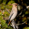 "Bohemian Waxwing © 2009 Chris M. Neri Whitefish Point, MI BOWA1  <div class=""ss-paypal-button""><div class=""ss-paypal-add-to-cart-section""><div class=""ss-paypal-product-options""><h4>Mat Sizes</h4><ul><li><a href=""https://www.paypal.com/cgi-bin/webscr?cmd=_cart&business=T77V5VKCW4K2U&lc=US&item_name=Bohemian%20Waxwing%20%C2%A9%202009%20Chris%20M.%20Neri%20Whitefish%20Point%2C%20MI%20BOWA1&item_number=http%3A%2F%2Fwww.nightflightimages.com%2FGalleries-1%2FUpper-Peninsula-of-MI%2Fi-SgdZcrq&button_subtype=products&no_note=0&cn=Add%20special%20instructions%20to%20the%20seller%3A&no_shipping=2&currency_code=USD&weight_unit=lbs&add=1&bn=PP-ShopCartBF%3Abtn_cart_SM.gif%3ANonHosted&on0=Mat%20Sizes&option_select0=5%20x%207&option_amount0=10.00&option_select1=8%20x%2010&option_amount1=18.00&option_select2=11%20x%2014&option_amount2=28.00&option_select3=card&option_amount3=4.00&option_index=0&charset=utf-8&submit=&os0=5%20x%207"" target=""paypal""><span>5 x 7 $11.00 USD</span><img src=""https://www.paypalobjects.com/en_US/i/btn/btn_cart_SM.gif""></a></li><li><a href=""https://www.paypal.com/cgi-bin/webscr?cmd=_cart&business=T77V5VKCW4K2U&lc=US&item_name=Bohemian%20Waxwing%20%C2%A9%202009%20Chris%20M.%20Neri%20Whitefish%20Point%2C%20MI%20BOWA1&item_number=http%3A%2F%2Fwww.nightflightimages.com%2FGalleries-1%2FUpper-Peninsula-of-MI%2Fi-SgdZcrq&button_subtype=products&no_note=0&cn=Add%20special%20instructions%20to%20the%20seller%3A&no_shipping=2&currency_code=USD&weight_unit=lbs&add=1&bn=PP-ShopCartBF%3Abtn_cart_SM.gif%3ANonHosted&on0=Mat%20Sizes&option_select0=5%20x%207&option_amount0=10.00&option_select1=8%20x%2010&option_amount1=18.00&option_select2=11%20x%2014&option_amount2=28.00&option_select3=card&option_amount3=4.00&option_index=0&charset=utf-8&submit=&os0=8%20x%2010"" target=""paypal""><span>8 x 10 $19.00 USD</span><img src=""https://www.paypalobjects.com/en_US/i/btn/btn_cart_SM.gif""></a></li><li><a href=""https://www.paypal.com/cgi-bin/webscr?cmd=_cart&business=T77V5VKCW4K2U&lc=US&item_name=Bohemian%20Waxwing%20%C2%A9%202009%20Chris%20M.%20Neri%20Whitefish%20Point%2C%20MI%20BOWA1&item_number=http%3A%2F%2Fwww.nightflightimages.com%2FGalleries-1%2FUpper-Peninsula-of-MI%2Fi-SgdZcrq&button_subtype=products&no_note=0&cn=Add%20special%20instructions%20to%20the%20seller%3A&no_shipping=2&currency_code=USD&weight_unit=lbs&add=1&bn=PP-ShopCartBF%3Abtn_cart_SM.gif%3ANonHosted&on0=Mat%20Sizes&option_select0=5%20x%207&option_amount0=10.00&option_select1=8%20x%2010&option_amount1=18.00&option_select2=11%20x%2014&option_amount2=28.00&option_select3=card&option_amount3=4.00&option_index=0&charset=utf-8&submit=&os0=11%20x%2014"" target=""paypal""><span>11 x 14 $29.00 USD</span><img src=""https://www.paypalobjects.com/en_US/i/btn/btn_cart_SM.gif""></a></li><li><a href=""https://www.paypal.com/cgi-bin/webscr?cmd=_cart&business=T77V5VKCW4K2U&lc=US&item_name=Bohemian%20Waxwing%20%C2%A9%202009%20Chris%20M.%20Neri%20Whitefish%20Point%2C%20MI%20BOWA1&item_number=http%3A%2F%2Fwww.nightflightimages.com%2FGalleries-1%2FUpper-Peninsula-of-MI%2Fi-SgdZcrq&button_subtype=products&no_note=0&cn=Add%20special%20instructions%20to%20the%20seller%3A&no_shipping=2&currency_code=USD&weight_unit=lbs&add=1&bn=PP-ShopCartBF%3Abtn_cart_SM.gif%3ANonHosted&on0=Mat%20Sizes&option_select0=5%20x%207&option_amount0=10.00&option_select1=8%20x%2010&option_amount1=18.00&option_select2=11%20x%2014&option_amount2=28.00&option_select3=card&option_amount3=4.00&option_index=0&charset=utf-8&submit=&os0=card"" target=""paypal""><span>card $5.00 USD</span><img src=""https://www.paypalobjects.com/en_US/i/btn/btn_cart_SM.gif""></a></li></ul></div></div> <div class=""ss-paypal-view-cart-section""><a href=""https://www.paypal.com/cgi-bin/webscr?cmd=_cart&business=T77V5VKCW4K2U&display=1&item_name=Bohemian%20Waxwing%20%C2%A9%202009%20Chris%20M.%20Neri%20Whitefish%20Point%2C%20MI%20BOWA1&item_number=http%3A%2F%2Fwww.nightflightimages.com%2FGalleries-1%2FUpper-Peninsula-of-MI%2Fi-SgdZcrq&charset=utf-8&submit="" target=""paypal"" class=""ss-paypal-submit-button""><img src=""https://www.paypalobjects.com/en_US/i/btn/btn_viewcart_LG.gif""></a></div></div><div class=""ss-paypal-button-end""></div>"