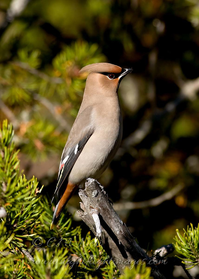 """Bohemian Waxwing © 2009 Chris M. Neri Whitefish Point, MI BOWA1  <div class=""""ss-paypal-button""""><div class=""""ss-paypal-add-to-cart-section""""><div class=""""ss-paypal-product-options""""><h4>Mat Sizes</h4><ul><li><a href=""""https://www.paypal.com/cgi-bin/webscr?cmd=_cart&business=T77V5VKCW4K2U&lc=US&item_name=Bohemian%20Waxwing%20%C2%A9%202009%20Chris%20M.%20Neri%20Whitefish%20Point%2C%20MI%20BOWA1&item_number=http%3A%2F%2Fwww.nightflightimages.com%2FGalleries-1%2FUpper-Peninsula-of-MI%2Fi-SgdZcrq&button_subtype=products&no_note=0&cn=Add%20special%20instructions%20to%20the%20seller%3A&no_shipping=2&currency_code=USD&weight_unit=lbs&add=1&bn=PP-ShopCartBF%3Abtn_cart_SM.gif%3ANonHosted&on0=Mat%20Sizes&option_select0=5%20x%207&option_amount0=10.00&option_select1=8%20x%2010&option_amount1=18.00&option_select2=11%20x%2014&option_amount2=28.00&option_select3=card&option_amount3=4.00&option_index=0&charset=utf-8&submit=&os0=5%20x%207"""" target=""""paypal""""><span>5 x 7 $11.00 USD</span><img src=""""https://www.paypalobjects.com/en_US/i/btn/btn_cart_SM.gif""""></a></li><li><a href=""""https://www.paypal.com/cgi-bin/webscr?cmd=_cart&business=T77V5VKCW4K2U&lc=US&item_name=Bohemian%20Waxwing%20%C2%A9%202009%20Chris%20M.%20Neri%20Whitefish%20Point%2C%20MI%20BOWA1&item_number=http%3A%2F%2Fwww.nightflightimages.com%2FGalleries-1%2FUpper-Peninsula-of-MI%2Fi-SgdZcrq&button_subtype=products&no_note=0&cn=Add%20special%20instructions%20to%20the%20seller%3A&no_shipping=2&currency_code=USD&weight_unit=lbs&add=1&bn=PP-ShopCartBF%3Abtn_cart_SM.gif%3ANonHosted&on0=Mat%20Sizes&option_select0=5%20x%207&option_amount0=10.00&option_select1=8%20x%2010&option_amount1=18.00&option_select2=11%20x%2014&option_amount2=28.00&option_select3=card&option_amount3=4.00&option_index=0&charset=utf-8&submit=&os0=8%20x%2010"""" target=""""paypal""""><span>8 x 10 $19.00 USD</span><img src=""""https://www.paypalobjects.com/en_US/i/btn/btn_cart_SM.gif""""></a></li><li><a href=""""https://www.paypal.com/cgi-bin/webscr?cmd=_cart&business=T77V5VKCW4K2U&lc=US&i"""