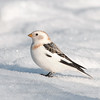 "Snow Bunting © 2013 C. M. Neri Whitefish Point, MI SNBU  <div class=""ss-paypal-button""><div class=""ss-paypal-add-to-cart-section""><div class=""ss-paypal-product-options""><h4>Mat Sizes</h4><ul><li><a href=""https://www.paypal.com/cgi-bin/webscr?cmd=_cart&amp;business=T77V5VKCW4K2U&amp;lc=US&amp;item_name=Snow%20Bunting%20%C2%A9%202013%20C.%20M.%20Neri%20Whitefish%20Point%2C%20MI%20SNBU&amp;item_number=http%3A%2F%2Fwww.nightflightimages.com%2FGalleries-1%2FUpper-Peninsula-of-MI%2Fi-W4BbdG5&amp;button_subtype=products&amp;no_note=0&amp;cn=Add%20special%20instructions%20to%20the%20seller%3A&amp;no_shipping=2&amp;currency_code=USD&amp;weight_unit=lbs&amp;add=1&amp;bn=PP-ShopCartBF%3Abtn_cart_SM.gif%3ANonHosted&amp;on0=Mat%20Sizes&amp;option_select0=5%20x%207&amp;option_amount0=10.00&amp;option_select1=8%20x%2010&amp;option_amount1=18.00&amp;option_select2=11%20x%2014&amp;option_amount2=28.00&amp;option_select3=card&amp;option_amount3=4.00&amp;option_index=0&amp;charset=utf-8&amp;submit=&amp;os0=5%20x%207"" target=""paypal""><span>5 x 7 $11.00 USD</span><img src=""https://www.paypalobjects.com/en_US/i/btn/btn_cart_SM.gif""></a></li><li><a href=""https://www.paypal.com/cgi-bin/webscr?cmd=_cart&amp;business=T77V5VKCW4K2U&amp;lc=US&amp;item_name=Snow%20Bunting%20%C2%A9%202013%20C.%20M.%20Neri%20Whitefish%20Point%2C%20MI%20SNBU&amp;item_number=http%3A%2F%2Fwww.nightflightimages.com%2FGalleries-1%2FUpper-Peninsula-of-MI%2Fi-W4BbdG5&amp;button_subtype=products&amp;no_note=0&amp;cn=Add%20special%20instructions%20to%20the%20seller%3A&amp;no_shipping=2&amp;currency_code=USD&amp;weight_unit=lbs&amp;add=1&amp;bn=PP-ShopCartBF%3Abtn_cart_SM.gif%3ANonHosted&amp;on0=Mat%20Sizes&amp;option_select0=5%20x%207&amp;option_amount0=10.00&amp;option_select1=8%20x%2010&amp;option_amount1=18.00&amp;option_select2=11%20x%2014&amp;option_amount2=28.00&amp;option_select3=card&amp;option_amount3=4.00&amp;option_index=0&amp;charset=utf-8&amp;submit=&amp;os0=8%20x%2010"" target=""paypal""><span>8 x 10 $19.00 USD</span><img src=""https://www.paypalobjects.com/en_US/i/btn/btn_cart_SM.gif""></a></li><li><a href=""https://www.paypal.com/cgi-bin/webscr?cmd=_cart&amp;business=T77V5VKCW4K2U&amp;lc=US&amp;item_name=Snow%20Bunting%20%C2%A9%202013%20C.%20M.%20Neri%20Whitefish%20Point%2C%20MI%20SNBU&amp;item_number=http%3A%2F%2Fwww.nightflightimages.com%2FGalleries-1%2FUpper-Peninsula-of-MI%2Fi-W4BbdG5&amp;button_subtype=products&amp;no_note=0&amp;cn=Add%20special%20instructions%20to%20the%20seller%3A&amp;no_shipping=2&amp;currency_code=USD&amp;weight_unit=lbs&amp;add=1&amp;bn=PP-ShopCartBF%3Abtn_cart_SM.gif%3ANonHosted&amp;on0=Mat%20Sizes&amp;option_select0=5%20x%207&amp;option_amount0=10.00&amp;option_select1=8%20x%2010&amp;option_amount1=18.00&amp;option_select2=11%20x%2014&amp;option_amount2=28.00&amp;option_select3=card&amp;option_amount3=4.00&amp;option_index=0&amp;charset=utf-8&amp;submit=&amp;os0=11%20x%2014"" target=""paypal""><span>11 x 14 $29.00 USD</span><img src=""https://www.paypalobjects.com/en_US/i/btn/btn_cart_SM.gif""></a></li><li><a href=""https://www.paypal.com/cgi-bin/webscr?cmd=_cart&amp;business=T77V5VKCW4K2U&amp;lc=US&amp;item_name=Snow%20Bunting%20%C2%A9%202013%20C.%20M.%20Neri%20Whitefish%20Point%2C%20MI%20SNBU&amp;item_number=http%3A%2F%2Fwww.nightflightimages.com%2FGalleries-1%2FUpper-Peninsula-of-MI%2Fi-W4BbdG5&amp;button_subtype=products&amp;no_note=0&amp;cn=Add%20special%20instructions%20to%20the%20seller%3A&amp;no_shipping=2&amp;currency_code=USD&amp;weight_unit=lbs&amp;add=1&amp;bn=PP-ShopCartBF%3Abtn_cart_SM.gif%3ANonHosted&amp;on0=Mat%20Sizes&amp;option_select0=5%20x%207&amp;option_amount0=10.00&amp;option_select1=8%20x%2010&amp;option_amount1=18.00&amp;option_select2=11%20x%2014&amp;option_amount2=28.00&amp;option_select3=card&amp;option_amount3=4.00&amp;option_index=0&amp;charset=utf-8&amp;submit=&amp;os0=card"" target=""paypal""><span>card $5.00 USD</span><img src=""https://www.paypalobjects.com/en_US/i/btn/btn_cart_SM.gif""></a></li></ul></div></div> <div class=""ss-paypal-view-cart-section""><a href=""https://www.paypal.com/cgi-bin/webscr?cmd=_cart&amp;business=T77V5VKCW4K2U&amp;display=1&amp;item_name=Snow%20Bunting%20%C2%A9%202013%20C.%20M.%20Neri%20Whitefish%20Point%2C%20MI%20SNBU&amp;item_number=http%3A%2F%2Fwww.nightflightimages.com%2FGalleries-1%2FUpper-Peninsula-of-MI%2Fi-W4BbdG5&amp;charset=utf-8&amp;submit="" target=""paypal"" class=""ss-paypal-submit-button""><img src=""https://www.paypalobjects.com/en_US/i/btn/btn_viewcart_LG.gif""></a></div></div><div class=""ss-paypal-button-end""></div>"