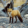 "Red Fox  © 2004 C. M. Neri.  Whitefish Point, MI FOX  <div class=""ss-paypal-button""><div class=""ss-paypal-add-to-cart-section""><div class=""ss-paypal-product-options""><h4>Mat Sizes</h4><ul><li><a href=""https://www.paypal.com/cgi-bin/webscr?cmd=_cart&amp;business=T77V5VKCW4K2U&amp;lc=US&amp;item_name=Red%20Fox%20%20%C2%A9%202004%20C.%20M.%20Neri.%20%20Whitefish%20Point%2C%20MI%20FOX&amp;item_number=http%3A%2F%2Fwww.nightflightimages.com%2FGalleries-1%2FMammals%2Fi-WWMLkFn&amp;button_subtype=products&amp;no_note=0&amp;cn=Add%20special%20instructions%20to%20the%20seller%3A&amp;no_shipping=2&amp;currency_code=USD&amp;weight_unit=lbs&amp;add=1&amp;bn=PP-ShopCartBF%3Abtn_cart_SM.gif%3ANonHosted&amp;on0=Mat%20Sizes&amp;option_select0=5%20x%207&amp;option_amount0=10.00&amp;option_select1=8%20x%2010&amp;option_amount1=18.00&amp;option_select2=11%20x%2014&amp;option_amount2=28.00&amp;option_select3=card&amp;option_amount3=4.00&amp;option_index=0&amp;charset=utf-8&amp;submit=&amp;os0=5%20x%207"" target=""paypal""><span>5 x 7 $11.00 USD</span><img src=""https://www.paypalobjects.com/en_US/i/btn/btn_cart_SM.gif""></a></li><li><a href=""https://www.paypal.com/cgi-bin/webscr?cmd=_cart&amp;business=T77V5VKCW4K2U&amp;lc=US&amp;item_name=Red%20Fox%20%20%C2%A9%202004%20C.%20M.%20Neri.%20%20Whitefish%20Point%2C%20MI%20FOX&amp;item_number=http%3A%2F%2Fwww.nightflightimages.com%2FGalleries-1%2FMammals%2Fi-WWMLkFn&amp;button_subtype=products&amp;no_note=0&amp;cn=Add%20special%20instructions%20to%20the%20seller%3A&amp;no_shipping=2&amp;currency_code=USD&amp;weight_unit=lbs&amp;add=1&amp;bn=PP-ShopCartBF%3Abtn_cart_SM.gif%3ANonHosted&amp;on0=Mat%20Sizes&amp;option_select0=5%20x%207&amp;option_amount0=10.00&amp;option_select1=8%20x%2010&amp;option_amount1=18.00&amp;option_select2=11%20x%2014&amp;option_amount2=28.00&amp;option_select3=card&amp;option_amount3=4.00&amp;option_index=0&amp;charset=utf-8&amp;submit=&amp;os0=8%20x%2010"" target=""paypal""><span>8 x 10 $19.00 USD</span><img src=""https://www.paypalobjects.com/en_US/i/btn/btn_cart_SM.gif""></a></li><li><a href=""https://www.paypal.com/cgi-bin/webscr?cmd=_cart&amp;business=T77V5VKCW4K2U&amp;lc=US&amp;item_name=Red%20Fox%20%20%C2%A9%202004%20C.%20M.%20Neri.%20%20Whitefish%20Point%2C%20MI%20FOX&amp;item_number=http%3A%2F%2Fwww.nightflightimages.com%2FGalleries-1%2FMammals%2Fi-WWMLkFn&amp;button_subtype=products&amp;no_note=0&amp;cn=Add%20special%20instructions%20to%20the%20seller%3A&amp;no_shipping=2&amp;currency_code=USD&amp;weight_unit=lbs&amp;add=1&amp;bn=PP-ShopCartBF%3Abtn_cart_SM.gif%3ANonHosted&amp;on0=Mat%20Sizes&amp;option_select0=5%20x%207&amp;option_amount0=10.00&amp;option_select1=8%20x%2010&amp;option_amount1=18.00&amp;option_select2=11%20x%2014&amp;option_amount2=28.00&amp;option_select3=card&amp;option_amount3=4.00&amp;option_index=0&amp;charset=utf-8&amp;submit=&amp;os0=11%20x%2014"" target=""paypal""><span>11 x 14 $29.00 USD</span><img src=""https://www.paypalobjects.com/en_US/i/btn/btn_cart_SM.gif""></a></li><li><a href=""https://www.paypal.com/cgi-bin/webscr?cmd=_cart&amp;business=T77V5VKCW4K2U&amp;lc=US&amp;item_name=Red%20Fox%20%20%C2%A9%202004%20C.%20M.%20Neri.%20%20Whitefish%20Point%2C%20MI%20FOX&amp;item_number=http%3A%2F%2Fwww.nightflightimages.com%2FGalleries-1%2FMammals%2Fi-WWMLkFn&amp;button_subtype=products&amp;no_note=0&amp;cn=Add%20special%20instructions%20to%20the%20seller%3A&amp;no_shipping=2&amp;currency_code=USD&amp;weight_unit=lbs&amp;add=1&amp;bn=PP-ShopCartBF%3Abtn_cart_SM.gif%3ANonHosted&amp;on0=Mat%20Sizes&amp;option_select0=5%20x%207&amp;option_amount0=10.00&amp;option_select1=8%20x%2010&amp;option_amount1=18.00&amp;option_select2=11%20x%2014&amp;option_amount2=28.00&amp;option_select3=card&amp;option_amount3=4.00&amp;option_index=0&amp;charset=utf-8&amp;submit=&amp;os0=card"" target=""paypal""><span>card $5.00 USD</span><img src=""https://www.paypalobjects.com/en_US/i/btn/btn_cart_SM.gif""></a></li></ul></div></div> <div class=""ss-paypal-view-cart-section""><a href=""https://www.paypal.com/cgi-bin/webscr?cmd=_cart&amp;business=T77V5VKCW4K2U&amp;display=1&amp;item_name=Red%20Fox%20%20%C2%A9%202004%20C.%20M.%20Neri.%20%20Whitefish%20Point%2C%20MI%20FOX&amp;item_number=http%3A%2F%2Fwww.nightflightimages.com%2FGalleries-1%2FMammals%2Fi-WWMLkFn&amp;charset=utf-8&amp;submit="" target=""paypal"" class=""ss-paypal-submit-button""><img src=""https://www.paypalobjects.com/en_US/i/btn/btn_viewcart_LG.gif""></a></div></div><div class=""ss-paypal-button-end""></div>"