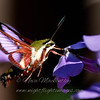 """Clear-winged Sphinx Moth 2 © 2012 Nova Mackentley Whitefish Point, MI CWS  <div class=""""ss-paypal-button""""><div class=""""ss-paypal-add-to-cart-section""""><div class=""""ss-paypal-product-options""""><h4>Mat Sizes</h4><ul><li><a href=""""https://www.paypal.com/cgi-bin/webscr?cmd=_cart&amp;business=T77V5VKCW4K2U&amp;lc=US&amp;item_name=Clear-winged%20Sphinx%20Moth%202%20%C2%A9%202012%20Nova%20Mackentley%20Whitefish%20Point%2C%20MI%20CWS&amp;item_number=http%3A%2F%2Fwww.nightflightimages.com%2FGalleries-1%2FButterflies%2Fi-XdpZgsr&amp;button_subtype=products&amp;no_note=0&amp;cn=Add%20special%20instructions%20to%20the%20seller%3A&amp;no_shipping=2&amp;currency_code=USD&amp;weight_unit=lbs&amp;add=1&amp;bn=PP-ShopCartBF%3Abtn_cart_SM.gif%3ANonHosted&amp;on0=Mat%20Sizes&amp;option_select0=5%20x%207&amp;option_amount0=10.00&amp;option_select1=8%20x%2010&amp;option_amount1=18.00&amp;option_select2=11%20x%2014&amp;option_amount2=28.00&amp;option_select3=card&amp;option_amount3=4.00&amp;option_index=0&amp;charset=utf-8&amp;submit=&amp;os0=5%20x%207"""" target=""""paypal""""><span>5 x 7 $11.00 USD</span><img src=""""https://www.paypalobjects.com/en_US/i/btn/btn_cart_SM.gif""""></a></li><li><a href=""""https://www.paypal.com/cgi-bin/webscr?cmd=_cart&amp;business=T77V5VKCW4K2U&amp;lc=US&amp;item_name=Clear-winged%20Sphinx%20Moth%202%20%C2%A9%202012%20Nova%20Mackentley%20Whitefish%20Point%2C%20MI%20CWS&amp;item_number=http%3A%2F%2Fwww.nightflightimages.com%2FGalleries-1%2FButterflies%2Fi-XdpZgsr&amp;button_subtype=products&amp;no_note=0&amp;cn=Add%20special%20instructions%20to%20the%20seller%3A&amp;no_shipping=2&amp;currency_code=USD&amp;weight_unit=lbs&amp;add=1&amp;bn=PP-ShopCartBF%3Abtn_cart_SM.gif%3ANonHosted&amp;on0=Mat%20Sizes&amp;option_select0=5%20x%207&amp;option_amount0=10.00&amp;option_select1=8%20x%2010&amp;option_amount1=18.00&amp;option_select2=11%20x%2014&amp;option_amount2=28.00&amp;option_select3=card&amp;option_amount3=4.00&amp;option_index=0&amp;charset=utf-8&amp;submit=&amp;os0=8%20x%2010"""" t"""