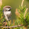 "Boreal Chickadee © 2011 C. M. Neri Whitefish Point, MI BOCH2  <div class=""ss-paypal-button""><div class=""ss-paypal-add-to-cart-section""><div class=""ss-paypal-product-options""><h4>Mat Sizes</h4><ul><li><a href=""https://www.paypal.com/cgi-bin/webscr?cmd=_cart&business=T77V5VKCW4K2U&lc=US&item_name=Boreal%20Chickadee%20%C2%A9%202011%20C.%20M.%20Neri%20Whitefish%20Point%2C%20MI%20BOCH2&item_number=http%3A%2F%2Fwww.nightflightimages.com%2FGalleries-1%2FUpper-Peninsula-of-MI%2Fi-bLdnZx8&button_subtype=products&no_note=0&cn=Add%20special%20instructions%20to%20the%20seller%3A&no_shipping=2&currency_code=USD&weight_unit=lbs&add=1&bn=PP-ShopCartBF%3Abtn_cart_SM.gif%3ANonHosted&on0=Mat%20Sizes&option_select0=5%20x%207&option_amount0=10.00&option_select1=8%20x%2010&option_amount1=18.00&option_select2=11%20x%2014&option_amount2=28.00&option_select3=card&option_amount3=4.00&option_index=0&charset=utf-8&submit=&os0=5%20x%207"" target=""paypal""><span>5 x 7 $11.00 USD</span><img src=""https://www.paypalobjects.com/en_US/i/btn/btn_cart_SM.gif""></a></li><li><a href=""https://www.paypal.com/cgi-bin/webscr?cmd=_cart&business=T77V5VKCW4K2U&lc=US&item_name=Boreal%20Chickadee%20%C2%A9%202011%20C.%20M.%20Neri%20Whitefish%20Point%2C%20MI%20BOCH2&item_number=http%3A%2F%2Fwww.nightflightimages.com%2FGalleries-1%2FUpper-Peninsula-of-MI%2Fi-bLdnZx8&button_subtype=products&no_note=0&cn=Add%20special%20instructions%20to%20the%20seller%3A&no_shipping=2&currency_code=USD&weight_unit=lbs&add=1&bn=PP-ShopCartBF%3Abtn_cart_SM.gif%3ANonHosted&on0=Mat%20Sizes&option_select0=5%20x%207&option_amount0=10.00&option_select1=8%20x%2010&option_amount1=18.00&option_select2=11%20x%2014&option_amount2=28.00&option_select3=card&option_amount3=4.00&option_index=0&charset=utf-8&submit=&os0=8%20x%2010"" target=""paypal""><span>8 x 10 $19.00 USD</span><img src=""https://www.paypalobjects.com/en_US/i/btn/btn_cart_SM.gif""></a></li><li><a href=""https://www.paypal.com/cgi-bin/webscr?cmd=_cart&business=T77V5VKCW4K2U&lc=US&item_name=Boreal%20Chickadee%20%C2%A9%202011%20C.%20M.%20Neri%20Whitefish%20Point%2C%20MI%20BOCH2&item_number=http%3A%2F%2Fwww.nightflightimages.com%2FGalleries-1%2FUpper-Peninsula-of-MI%2Fi-bLdnZx8&button_subtype=products&no_note=0&cn=Add%20special%20instructions%20to%20the%20seller%3A&no_shipping=2&currency_code=USD&weight_unit=lbs&add=1&bn=PP-ShopCartBF%3Abtn_cart_SM.gif%3ANonHosted&on0=Mat%20Sizes&option_select0=5%20x%207&option_amount0=10.00&option_select1=8%20x%2010&option_amount1=18.00&option_select2=11%20x%2014&option_amount2=28.00&option_select3=card&option_amount3=4.00&option_index=0&charset=utf-8&submit=&os0=11%20x%2014"" target=""paypal""><span>11 x 14 $29.00 USD</span><img src=""https://www.paypalobjects.com/en_US/i/btn/btn_cart_SM.gif""></a></li><li><a href=""https://www.paypal.com/cgi-bin/webscr?cmd=_cart&business=T77V5VKCW4K2U&lc=US&item_name=Boreal%20Chickadee%20%C2%A9%202011%20C.%20M.%20Neri%20Whitefish%20Point%2C%20MI%20BOCH2&item_number=http%3A%2F%2Fwww.nightflightimages.com%2FGalleries-1%2FUpper-Peninsula-of-MI%2Fi-bLdnZx8&button_subtype=products&no_note=0&cn=Add%20special%20instructions%20to%20the%20seller%3A&no_shipping=2&currency_code=USD&weight_unit=lbs&add=1&bn=PP-ShopCartBF%3Abtn_cart_SM.gif%3ANonHosted&on0=Mat%20Sizes&option_select0=5%20x%207&option_amount0=10.00&option_select1=8%20x%2010&option_amount1=18.00&option_select2=11%20x%2014&option_amount2=28.00&option_select3=card&option_amount3=4.00&option_index=0&charset=utf-8&submit=&os0=card"" target=""paypal""><span>card $5.00 USD</span><img src=""https://www.paypalobjects.com/en_US/i/btn/btn_cart_SM.gif""></a></li></ul></div></div> <div class=""ss-paypal-view-cart-section""><a href=""https://www.paypal.com/cgi-bin/webscr?cmd=_cart&business=T77V5VKCW4K2U&display=1&item_name=Boreal%20Chickadee%20%C2%A9%202011%20C.%20M.%20Neri%20Whitefish%20Point%2C%20MI%20BOCH2&item_number=http%3A%2F%2Fwww.nightflightimages.com%2FGalleries-1%2FUpper-Peninsula-of-MI%2Fi-bLdnZx8&charset=utf-8&submit="" target=""paypal"" class=""ss-paypal-submit-button""><img src=""https://www.paypalobjects.com/en_US/i/btn/btn_viewcart_LG.gif""></a></div></div><div class=""ss-paypal-button-end""></div>"