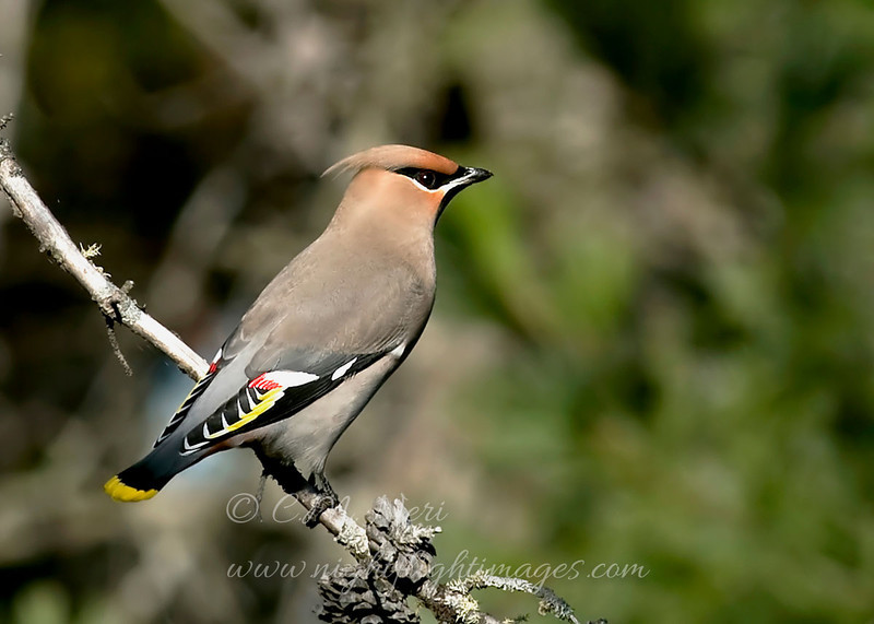 "Bohemian Waxwing © 2009 C. M. Neri Whitefish Point, MI BOWAUP  <div class=""ss-paypal-button""><div class=""ss-paypal-add-to-cart-section""><div class=""ss-paypal-product-options""><h4>Mat Sizes</h4><ul><li><a href=""https://www.paypal.com/cgi-bin/webscr?cmd=_cart&amp;business=T77V5VKCW4K2U&amp;lc=US&amp;item_name=Bohemian%20Waxwing%20%C2%A9%202009%20C.%20M.%20Neri%20Whitefish%20Point%2C%20MI%20BOWAUP&amp;item_number=http%3A%2F%2Fwww.nightflightimages.com%2FGalleries-1%2FUpper-Peninsula-of-MI%2Fi-bT4Bh4J&amp;button_subtype=products&amp;no_note=0&amp;cn=Add%20special%20instructions%20to%20the%20seller%3A&amp;no_shipping=2&amp;currency_code=USD&amp;weight_unit=lbs&amp;add=1&amp;bn=PP-ShopCartBF%3Abtn_cart_SM.gif%3ANonHosted&amp;on0=Mat%20Sizes&amp;option_select0=5%20x%207&amp;option_amount0=10.00&amp;option_select1=8%20x%2010&amp;option_amount1=18.00&amp;option_select2=11%20x%2014&amp;option_amount2=28.00&amp;option_select3=card&amp;option_amount3=4.00&amp;option_index=0&amp;charset=utf-8&amp;submit=&amp;os0=5%20x%207"" target=""paypal""><span>5 x 7 $11.00 USD</span><img src=""https://www.paypalobjects.com/en_US/i/btn/btn_cart_SM.gif""></a></li><li><a href=""https://www.paypal.com/cgi-bin/webscr?cmd=_cart&amp;business=T77V5VKCW4K2U&amp;lc=US&amp;item_name=Bohemian%20Waxwing%20%C2%A9%202009%20C.%20M.%20Neri%20Whitefish%20Point%2C%20MI%20BOWAUP&amp;item_number=http%3A%2F%2Fwww.nightflightimages.com%2FGalleries-1%2FUpper-Peninsula-of-MI%2Fi-bT4Bh4J&amp;button_subtype=products&amp;no_note=0&amp;cn=Add%20special%20instructions%20to%20the%20seller%3A&amp;no_shipping=2&amp;currency_code=USD&amp;weight_unit=lbs&amp;add=1&amp;bn=PP-ShopCartBF%3Abtn_cart_SM.gif%3ANonHosted&amp;on0=Mat%20Sizes&amp;option_select0=5%20x%207&amp;option_amount0=10.00&amp;option_select1=8%20x%2010&amp;option_amount1=18.00&amp;option_select2=11%20x%2014&amp;option_amount2=28.00&amp;option_select3=card&amp;option_amount3=4.00&amp;option_index=0&amp;charset=utf-8&amp;submit=&amp;os0=8%20x%2010"" target=""paypal""><span>8 x 10 $19.00 USD</span><img src=""https://www.paypalobjects.com/en_US/i/btn/btn_cart_SM.gif""></a></li><li><a href=""https://www.paypal.com/cgi-bin/webscr?cmd=_cart&amp;business=T77V5VKCW4K2U&amp;lc=US&amp;item_name=Bohemian%20Waxwing%20%C2%A9%202009%20C.%20M.%20Neri%20Whitefish%20Point%2C%20MI%20BOWAUP&amp;item_number=http%3A%2F%2Fwww.nightflightimages.com%2FGalleries-1%2FUpper-Peninsula-of-MI%2Fi-bT4Bh4J&amp;button_subtype=products&amp;no_note=0&amp;cn=Add%20special%20instructions%20to%20the%20seller%3A&amp;no_shipping=2&amp;currency_code=USD&amp;weight_unit=lbs&amp;add=1&amp;bn=PP-ShopCartBF%3Abtn_cart_SM.gif%3ANonHosted&amp;on0=Mat%20Sizes&amp;option_select0=5%20x%207&amp;option_amount0=10.00&amp;option_select1=8%20x%2010&amp;option_amount1=18.00&amp;option_select2=11%20x%2014&amp;option_amount2=28.00&amp;option_select3=card&amp;option_amount3=4.00&amp;option_index=0&amp;charset=utf-8&amp;submit=&amp;os0=11%20x%2014"" target=""paypal""><span>11 x 14 $29.00 USD</span><img src=""https://www.paypalobjects.com/en_US/i/btn/btn_cart_SM.gif""></a></li><li><a href=""https://www.paypal.com/cgi-bin/webscr?cmd=_cart&amp;business=T77V5VKCW4K2U&amp;lc=US&amp;item_name=Bohemian%20Waxwing%20%C2%A9%202009%20C.%20M.%20Neri%20Whitefish%20Point%2C%20MI%20BOWAUP&amp;item_number=http%3A%2F%2Fwww.nightflightimages.com%2FGalleries-1%2FUpper-Peninsula-of-MI%2Fi-bT4Bh4J&amp;button_subtype=products&amp;no_note=0&amp;cn=Add%20special%20instructions%20to%20the%20seller%3A&amp;no_shipping=2&amp;currency_code=USD&amp;weight_unit=lbs&amp;add=1&amp;bn=PP-ShopCartBF%3Abtn_cart_SM.gif%3ANonHosted&amp;on0=Mat%20Sizes&amp;option_select0=5%20x%207&amp;option_amount0=10.00&amp;option_select1=8%20x%2010&amp;option_amount1=18.00&amp;option_select2=11%20x%2014&amp;option_amount2=28.00&amp;option_select3=card&amp;option_amount3=4.00&amp;option_index=0&amp;charset=utf-8&amp;submit=&amp;os0=card"" target=""paypal""><span>card $5.00 USD</span><img src=""https://www.paypalobjects.com/en_US/i/btn/btn_cart_SM.gif""></a></li></ul></div></div> <div class=""ss-paypal-view-cart-section""><a href=""https://www.paypal.com/cgi-bin/webscr?cmd=_cart&amp;business=T77V5VKCW4K2U&amp;display=1&amp;item_name=Bohemian%20Waxwing%20%C2%A9%202009%20C.%20M.%20Neri%20Whitefish%20Point%2C%20MI%20BOWAUP&amp;item_number=http%3A%2F%2Fwww.nightflightimages.com%2FGalleries-1%2FUpper-Peninsula-of-MI%2Fi-bT4Bh4J&amp;charset=utf-8&amp;submit="" target=""paypal"" class=""ss-paypal-submit-button""><img src=""https://www.paypalobjects.com/en_US/i/btn/btn_viewcart_LG.gif""></a></div></div><div class=""ss-paypal-button-end""></div>"