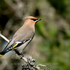 "Bohemian Waxwing © 2009 C. M. Neri Whitefish Point, MI BOWAUP  <div class=""ss-paypal-button""><div class=""ss-paypal-add-to-cart-section""><div class=""ss-paypal-product-options""><h4>Mat Sizes</h4><ul><li><a href=""https://www.paypal.com/cgi-bin/webscr?cmd=_cart&business=T77V5VKCW4K2U&lc=US&item_name=Bohemian%20Waxwing%20%C2%A9%202009%20C.%20M.%20Neri%20Whitefish%20Point%2C%20MI%20BOWAUP&item_number=http%3A%2F%2Fwww.nightflightimages.com%2FGalleries-1%2FUpper-Peninsula-of-MI%2Fi-bT4Bh4J&button_subtype=products&no_note=0&cn=Add%20special%20instructions%20to%20the%20seller%3A&no_shipping=2&currency_code=USD&weight_unit=lbs&add=1&bn=PP-ShopCartBF%3Abtn_cart_SM.gif%3ANonHosted&on0=Mat%20Sizes&option_select0=5%20x%207&option_amount0=10.00&option_select1=8%20x%2010&option_amount1=18.00&option_select2=11%20x%2014&option_amount2=28.00&option_select3=card&option_amount3=4.00&option_index=0&charset=utf-8&submit=&os0=5%20x%207"" target=""paypal""><span>5 x 7 $11.00 USD</span><img src=""https://www.paypalobjects.com/en_US/i/btn/btn_cart_SM.gif""></a></li><li><a href=""https://www.paypal.com/cgi-bin/webscr?cmd=_cart&business=T77V5VKCW4K2U&lc=US&item_name=Bohemian%20Waxwing%20%C2%A9%202009%20C.%20M.%20Neri%20Whitefish%20Point%2C%20MI%20BOWAUP&item_number=http%3A%2F%2Fwww.nightflightimages.com%2FGalleries-1%2FUpper-Peninsula-of-MI%2Fi-bT4Bh4J&button_subtype=products&no_note=0&cn=Add%20special%20instructions%20to%20the%20seller%3A&no_shipping=2&currency_code=USD&weight_unit=lbs&add=1&bn=PP-ShopCartBF%3Abtn_cart_SM.gif%3ANonHosted&on0=Mat%20Sizes&option_select0=5%20x%207&option_amount0=10.00&option_select1=8%20x%2010&option_amount1=18.00&option_select2=11%20x%2014&option_amount2=28.00&option_select3=card&option_amount3=4.00&option_index=0&charset=utf-8&submit=&os0=8%20x%2010"" target=""paypal""><span>8 x 10 $19.00 USD</span><img src=""https://www.paypalobjects.com/en_US/i/btn/btn_cart_SM.gif""></a></li><li><a href=""https://www.paypal.com/cgi-bin/webscr?cmd=_cart&business=T77V5VKCW4K2U&lc=US&item_name=Bohemian%20Waxwing%20%C2%A9%202009%20C.%20M.%20Neri%20Whitefish%20Point%2C%20MI%20BOWAUP&item_number=http%3A%2F%2Fwww.nightflightimages.com%2FGalleries-1%2FUpper-Peninsula-of-MI%2Fi-bT4Bh4J&button_subtype=products&no_note=0&cn=Add%20special%20instructions%20to%20the%20seller%3A&no_shipping=2&currency_code=USD&weight_unit=lbs&add=1&bn=PP-ShopCartBF%3Abtn_cart_SM.gif%3ANonHosted&on0=Mat%20Sizes&option_select0=5%20x%207&option_amount0=10.00&option_select1=8%20x%2010&option_amount1=18.00&option_select2=11%20x%2014&option_amount2=28.00&option_select3=card&option_amount3=4.00&option_index=0&charset=utf-8&submit=&os0=11%20x%2014"" target=""paypal""><span>11 x 14 $29.00 USD</span><img src=""https://www.paypalobjects.com/en_US/i/btn/btn_cart_SM.gif""></a></li><li><a href=""https://www.paypal.com/cgi-bin/webscr?cmd=_cart&business=T77V5VKCW4K2U&lc=US&item_name=Bohemian%20Waxwing%20%C2%A9%202009%20C.%20M.%20Neri%20Whitefish%20Point%2C%20MI%20BOWAUP&item_number=http%3A%2F%2Fwww.nightflightimages.com%2FGalleries-1%2FUpper-Peninsula-of-MI%2Fi-bT4Bh4J&button_subtype=products&no_note=0&cn=Add%20special%20instructions%20to%20the%20seller%3A&no_shipping=2&currency_code=USD&weight_unit=lbs&add=1&bn=PP-ShopCartBF%3Abtn_cart_SM.gif%3ANonHosted&on0=Mat%20Sizes&option_select0=5%20x%207&option_amount0=10.00&option_select1=8%20x%2010&option_amount1=18.00&option_select2=11%20x%2014&option_amount2=28.00&option_select3=card&option_amount3=4.00&option_index=0&charset=utf-8&submit=&os0=card"" target=""paypal""><span>card $5.00 USD</span><img src=""https://www.paypalobjects.com/en_US/i/btn/btn_cart_SM.gif""></a></li></ul></div></div> <div class=""ss-paypal-view-cart-section""><a href=""https://www.paypal.com/cgi-bin/webscr?cmd=_cart&business=T77V5VKCW4K2U&display=1&item_name=Bohemian%20Waxwing%20%C2%A9%202009%20C.%20M.%20Neri%20Whitefish%20Point%2C%20MI%20BOWAUP&item_number=http%3A%2F%2Fwww.nightflightimages.com%2FGalleries-1%2FUpper-Peninsula-of-MI%2Fi-bT4Bh4J&charset=utf-8&submit="" target=""paypal"" class=""ss-paypal-submit-button""><img src=""https://www.paypalobjects.com/en_US/i/btn/btn_viewcart_LG.gif""></a></div></div><div class=""ss-paypal-button-end""></div>"