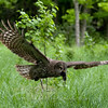 """Great Gray Owl © 2010 C. M. Neri. Chippewa County, MI  <div class=""""ss-paypal-button""""><div class=""""ss-paypal-add-to-cart-section""""><div class=""""ss-paypal-product-options""""><h4>Mat Sizes</h4><ul><li><a href=""""https://www.paypal.com/cgi-bin/webscr?cmd=_cart&business=T77V5VKCW4K2U&lc=US&item_name=Great%20Gray%20Owl%20%C2%A9%202010%20C.%20M.%20Neri.%20Chippewa%20County%2C%20MI&item_number=http%3A%2F%2Fwww.nightflightimages.com%2FGalleries-1%2FGGOW%2Fi-cdXQBBb&button_subtype=products&no_note=0&cn=Add%20special%20instructions%20to%20the%20seller%3A&no_shipping=2&currency_code=USD&weight_unit=lbs&add=1&bn=PP-ShopCartBF%3Abtn_cart_SM.gif%3ANonHosted&on0=Mat%20Sizes&option_select0=5%20x%207&option_amount0=10.00&option_select1=8%20x%2010&option_amount1=18.00&option_select2=11%20x%2014&option_amount2=28.00&option_select3=card&option_amount3=4.00&option_index=0&charset=utf-8&submit=&os0=5%20x%207"""" target=""""paypal""""><span>5 x 7 $11.00 USD</span><img src=""""https://www.paypalobjects.com/en_US/i/btn/btn_cart_SM.gif""""></a></li><li><a href=""""https://www.paypal.com/cgi-bin/webscr?cmd=_cart&business=T77V5VKCW4K2U&lc=US&item_name=Great%20Gray%20Owl%20%C2%A9%202010%20C.%20M.%20Neri.%20Chippewa%20County%2C%20MI&item_number=http%3A%2F%2Fwww.nightflightimages.com%2FGalleries-1%2FGGOW%2Fi-cdXQBBb&button_subtype=products&no_note=0&cn=Add%20special%20instructions%20to%20the%20seller%3A&no_shipping=2&currency_code=USD&weight_unit=lbs&add=1&bn=PP-ShopCartBF%3Abtn_cart_SM.gif%3ANonHosted&on0=Mat%20Sizes&option_select0=5%20x%207&option_amount0=10.00&option_select1=8%20x%2010&option_amount1=18.00&option_select2=11%20x%2014&option_amount2=28.00&option_select3=card&option_amount3=4.00&option_index=0&charset=utf-8&submit=&os0=8%20x%2010"""" target=""""paypal""""><span>8 x 10 $19.00 USD</span><img src=""""https://www.paypalobjects.com/en_US/i/btn/btn_cart_SM.gif""""></a></li><li><a href=""""https://www.paypal.com/cgi-bin/webscr?cmd=_cart&business=T77V5VKCW4K2U&lc=US&item_name=Great%20Gray%20Owl%20%C2%A9%202010%20C.%20M.%20Neri.%20"""