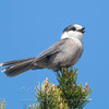 "Gray Jay singing © 2011 C. M. Neri Whitefish Point, MI GYJA  <div class=""ss-paypal-button""><div class=""ss-paypal-add-to-cart-section""><div class=""ss-paypal-product-options""><h4>Mat Sizes</h4><ul><li><a href=""https://www.paypal.com/cgi-bin/webscr?cmd=_cart&amp;business=T77V5VKCW4K2U&amp;lc=US&amp;item_name=Gray%20Jay%20singing%20%C2%A9%202011%20C.%20M.%20Neri%20Whitefish%20Point%2C%20MI%20GYJA&amp;item_number=http%3A%2F%2Fwww.nightflightimages.com%2FGalleries-1%2FUpper-Peninsula-of-MI%2Fi-dFqH5pd&amp;button_subtype=products&amp;no_note=0&amp;cn=Add%20special%20instructions%20to%20the%20seller%3A&amp;no_shipping=2&amp;currency_code=USD&amp;weight_unit=lbs&amp;add=1&amp;bn=PP-ShopCartBF%3Abtn_cart_SM.gif%3ANonHosted&amp;on0=Mat%20Sizes&amp;option_select0=5%20x%207&amp;option_amount0=10.00&amp;option_select1=8%20x%2010&amp;option_amount1=18.00&amp;option_select2=11%20x%2014&amp;option_amount2=28.00&amp;option_select3=card&amp;option_amount3=4.00&amp;option_index=0&amp;charset=utf-8&amp;submit=&amp;os0=5%20x%207"" target=""paypal""><span>5 x 7 $11.00 USD</span><img src=""https://www.paypalobjects.com/en_US/i/btn/btn_cart_SM.gif""></a></li><li><a href=""https://www.paypal.com/cgi-bin/webscr?cmd=_cart&amp;business=T77V5VKCW4K2U&amp;lc=US&amp;item_name=Gray%20Jay%20singing%20%C2%A9%202011%20C.%20M.%20Neri%20Whitefish%20Point%2C%20MI%20GYJA&amp;item_number=http%3A%2F%2Fwww.nightflightimages.com%2FGalleries-1%2FUpper-Peninsula-of-MI%2Fi-dFqH5pd&amp;button_subtype=products&amp;no_note=0&amp;cn=Add%20special%20instructions%20to%20the%20seller%3A&amp;no_shipping=2&amp;currency_code=USD&amp;weight_unit=lbs&amp;add=1&amp;bn=PP-ShopCartBF%3Abtn_cart_SM.gif%3ANonHosted&amp;on0=Mat%20Sizes&amp;option_select0=5%20x%207&amp;option_amount0=10.00&amp;option_select1=8%20x%2010&amp;option_amount1=18.00&amp;option_select2=11%20x%2014&amp;option_amount2=28.00&amp;option_select3=card&amp;option_amount3=4.00&amp;option_index=0&amp;charset=utf-8&amp;submit=&amp;os0=8%20x%2010"" target=""paypal""><span>8 x 10 $19.00 USD</span><img src=""https://www.paypalobjects.com/en_US/i/btn/btn_cart_SM.gif""></a></li><li><a href=""https://www.paypal.com/cgi-bin/webscr?cmd=_cart&amp;business=T77V5VKCW4K2U&amp;lc=US&amp;item_name=Gray%20Jay%20singing%20%C2%A9%202011%20C.%20M.%20Neri%20Whitefish%20Point%2C%20MI%20GYJA&amp;item_number=http%3A%2F%2Fwww.nightflightimages.com%2FGalleries-1%2FUpper-Peninsula-of-MI%2Fi-dFqH5pd&amp;button_subtype=products&amp;no_note=0&amp;cn=Add%20special%20instructions%20to%20the%20seller%3A&amp;no_shipping=2&amp;currency_code=USD&amp;weight_unit=lbs&amp;add=1&amp;bn=PP-ShopCartBF%3Abtn_cart_SM.gif%3ANonHosted&amp;on0=Mat%20Sizes&amp;option_select0=5%20x%207&amp;option_amount0=10.00&amp;option_select1=8%20x%2010&amp;option_amount1=18.00&amp;option_select2=11%20x%2014&amp;option_amount2=28.00&amp;option_select3=card&amp;option_amount3=4.00&amp;option_index=0&amp;charset=utf-8&amp;submit=&amp;os0=11%20x%2014"" target=""paypal""><span>11 x 14 $29.00 USD</span><img src=""https://www.paypalobjects.com/en_US/i/btn/btn_cart_SM.gif""></a></li><li><a href=""https://www.paypal.com/cgi-bin/webscr?cmd=_cart&amp;business=T77V5VKCW4K2U&amp;lc=US&amp;item_name=Gray%20Jay%20singing%20%C2%A9%202011%20C.%20M.%20Neri%20Whitefish%20Point%2C%20MI%20GYJA&amp;item_number=http%3A%2F%2Fwww.nightflightimages.com%2FGalleries-1%2FUpper-Peninsula-of-MI%2Fi-dFqH5pd&amp;button_subtype=products&amp;no_note=0&amp;cn=Add%20special%20instructions%20to%20the%20seller%3A&amp;no_shipping=2&amp;currency_code=USD&amp;weight_unit=lbs&amp;add=1&amp;bn=PP-ShopCartBF%3Abtn_cart_SM.gif%3ANonHosted&amp;on0=Mat%20Sizes&amp;option_select0=5%20x%207&amp;option_amount0=10.00&amp;option_select1=8%20x%2010&amp;option_amount1=18.00&amp;option_select2=11%20x%2014&amp;option_amount2=28.00&amp;option_select3=card&amp;option_amount3=4.00&amp;option_index=0&amp;charset=utf-8&amp;submit=&amp;os0=card"" target=""paypal""><span>card $5.00 USD</span><img src=""https://www.paypalobjects.com/en_US/i/btn/btn_cart_SM.gif""></a></li></ul></div></div> <div class=""ss-paypal-view-cart-section""><a href=""https://www.paypal.com/cgi-bin/webscr?cmd=_cart&amp;business=T77V5VKCW4K2U&amp;display=1&amp;item_name=Gray%20Jay%20singing%20%C2%A9%202011%20C.%20M.%20Neri%20Whitefish%20Point%2C%20MI%20GYJA&amp;item_number=http%3A%2F%2Fwww.nightflightimages.com%2FGalleries-1%2FUpper-Peninsula-of-MI%2Fi-dFqH5pd&amp;charset=utf-8&amp;submit="" target=""paypal"" class=""ss-paypal-submit-button""><img src=""https://www.paypalobjects.com/en_US/i/btn/btn_viewcart_LG.gif""></a></div></div><div class=""ss-paypal-button-end""></div>"