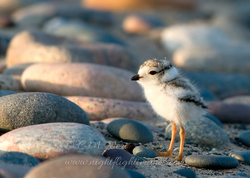 "Piping Plover chick © 2009 C. M. Neri.  Whitefish Point, MI PIPL  <div class=""ss-paypal-button""><div class=""ss-paypal-add-to-cart-section""><div class=""ss-paypal-product-options""><h4>Mat Sizes</h4><ul><li><a href=""https://www.paypal.com/cgi-bin/webscr?cmd=_cart&business=T77V5VKCW4K2U&lc=US&item_name=Piping%20Plover%20chick%20%C2%A9%202009%20C.%20M.%20Neri.%20%20Whitefish%20Point%2C%20MI%20PIPL&item_number=http%3A%2F%2Fwww.nightflightimages.com%2FGalleries-1%2FShore%2Fi-hMKHbhR&button_subtype=products&no_note=0&cn=Add%20special%20instructions%20to%20the%20seller%3A&no_shipping=2&currency_code=USD&weight_unit=lbs&add=1&bn=PP-ShopCartBF%3Abtn_cart_SM.gif%3ANonHosted&on0=Mat%20Sizes&option_select0=5%20x%207&option_amount0=10.00&option_select1=8%20x%2010&option_amount1=18.00&option_select2=11%20x%2014&option_amount2=28.00&option_select3=card&option_amount3=4.00&option_index=0&charset=utf-8&submit=&os0=5%20x%207"" target=""paypal""><span>5 x 7 $11.00 USD</span><img src=""https://www.paypalobjects.com/en_US/i/btn/btn_cart_SM.gif""></a></li><li><a href=""https://www.paypal.com/cgi-bin/webscr?cmd=_cart&business=T77V5VKCW4K2U&lc=US&item_name=Piping%20Plover%20chick%20%C2%A9%202009%20C.%20M.%20Neri.%20%20Whitefish%20Point%2C%20MI%20PIPL&item_number=http%3A%2F%2Fwww.nightflightimages.com%2FGalleries-1%2FShore%2Fi-hMKHbhR&button_subtype=products&no_note=0&cn=Add%20special%20instructions%20to%20the%20seller%3A&no_shipping=2&currency_code=USD&weight_unit=lbs&add=1&bn=PP-ShopCartBF%3Abtn_cart_SM.gif%3ANonHosted&on0=Mat%20Sizes&option_select0=5%20x%207&option_amount0=10.00&option_select1=8%20x%2010&option_amount1=18.00&option_select2=11%20x%2014&option_amount2=28.00&option_select3=card&option_amount3=4.00&option_index=0&charset=utf-8&submit=&os0=8%20x%2010"" target=""paypal""><span>8 x 10 $19.00 USD</span><img src=""https://www.paypalobjects.com/en_US/i/btn/btn_cart_SM.gif""></a></li><li><a href=""https://www.paypal.com/cgi-bin/webscr?cmd=_cart&business=T77V5VKCW4K2U&lc=US&item_name=Piping%20Plover%20chick%20%C2%A9%202009%20C.%20M.%20Neri.%20%20Whitefish%20Point%2C%20MI%20PIPL&item_number=http%3A%2F%2Fwww.nightflightimages.com%2FGalleries-1%2FShore%2Fi-hMKHbhR&button_subtype=products&no_note=0&cn=Add%20special%20instructions%20to%20the%20seller%3A&no_shipping=2&currency_code=USD&weight_unit=lbs&add=1&bn=PP-ShopCartBF%3Abtn_cart_SM.gif%3ANonHosted&on0=Mat%20Sizes&option_select0=5%20x%207&option_amount0=10.00&option_select1=8%20x%2010&option_amount1=18.00&option_select2=11%20x%2014&option_amount2=28.00&option_select3=card&option_amount3=4.00&option_index=0&charset=utf-8&submit=&os0=11%20x%2014"" target=""paypal""><span>11 x 14 $29.00 USD</span><img src=""https://www.paypalobjects.com/en_US/i/btn/btn_cart_SM.gif""></a></li><li><a href=""https://www.paypal.com/cgi-bin/webscr?cmd=_cart&business=T77V5VKCW4K2U&lc=US&item_name=Piping%20Plover%20chick%20%C2%A9%202009%20C.%20M.%20Neri.%20%20Whitefish%20Point%2C%20MI%20PIPL&item_number=http%3A%2F%2Fwww.nightflightimages.com%2FGalleries-1%2FShore%2Fi-hMKHbhR&button_subtype=products&no_note=0&cn=Add%20special%20instructions%20to%20the%20seller%3A&no_shipping=2&currency_code=USD&weight_unit=lbs&add=1&bn=PP-ShopCartBF%3Abtn_cart_SM.gif%3ANonHosted&on0=Mat%20Sizes&option_select0=5%20x%207&option_amount0=10.00&option_select1=8%20x%2010&option_amount1=18.00&option_select2=11%20x%2014&option_amount2=28.00&option_select3=card&option_amount3=4.00&option_index=0&charset=utf-8&submit=&os0=card"" target=""paypal""><span>card $5.00 USD</span><img src=""https://www.paypalobjects.com/en_US/i/btn/btn_cart_SM.gif""></a></li></ul></div></div> <div class=""ss-paypal-view-cart-section""><a href=""https://www.paypal.com/cgi-bin/webscr?cmd=_cart&business=T77V5VKCW4K2U&display=1&item_name=Piping%20Plover%20chick%20%C2%A9%202009%20C.%20M.%20Neri.%20%20Whitefish%20Point%2C%20MI%20PIPL&item_number=http%3A%2F%2Fwww.nightflightimages.com%2FGalleries-1%2FShore%2Fi-hMKHbhR&charset=utf-8&submit="" target=""paypal"" class=""ss-paypal-submit-button""><img src=""https://www.paypalobjects.com/en_US/i/btn/btn_viewcart_LG.gif""></a></div></div><div class=""ss-paypal-button-end""></div>"