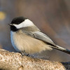"Black-capped Chickadee © 2007 Nova Mackentley Whitefish Point, MI CHL  <div class=""ss-paypal-button""><div class=""ss-paypal-add-to-cart-section""><div class=""ss-paypal-product-options""><h4>Mat Sizes</h4><ul><li><a href=""https://www.paypal.com/cgi-bin/webscr?cmd=_cart&business=T77V5VKCW4K2U&lc=US&item_name=Black-capped%20Chickadee%20%C2%A9%202007%20Nova%20Mackentley%20Whitefish%20Point%2C%20MI%20CHL&item_number=http%3A%2F%2Fwww.nightflightimages.com%2FGalleries-1%2FUpper-Peninsula-of-MI%2Fi-hQ4Hvhx&button_subtype=products&no_note=0&cn=Add%20special%20instructions%20to%20the%20seller%3A&no_shipping=2&currency_code=USD&weight_unit=lbs&add=1&bn=PP-ShopCartBF%3Abtn_cart_SM.gif%3ANonHosted&on0=Mat%20Sizes&option_select0=5%20x%207&option_amount0=10.00&option_select1=8%20x%2010&option_amount1=18.00&option_select2=11%20x%2014&option_amount2=28.00&option_select3=card&option_amount3=4.00&option_index=0&charset=utf-8&submit=&os0=5%20x%207"" target=""paypal""><span>5 x 7 $11.00 USD</span><img src=""https://www.paypalobjects.com/en_US/i/btn/btn_cart_SM.gif""></a></li><li><a href=""https://www.paypal.com/cgi-bin/webscr?cmd=_cart&business=T77V5VKCW4K2U&lc=US&item_name=Black-capped%20Chickadee%20%C2%A9%202007%20Nova%20Mackentley%20Whitefish%20Point%2C%20MI%20CHL&item_number=http%3A%2F%2Fwww.nightflightimages.com%2FGalleries-1%2FUpper-Peninsula-of-MI%2Fi-hQ4Hvhx&button_subtype=products&no_note=0&cn=Add%20special%20instructions%20to%20the%20seller%3A&no_shipping=2&currency_code=USD&weight_unit=lbs&add=1&bn=PP-ShopCartBF%3Abtn_cart_SM.gif%3ANonHosted&on0=Mat%20Sizes&option_select0=5%20x%207&option_amount0=10.00&option_select1=8%20x%2010&option_amount1=18.00&option_select2=11%20x%2014&option_amount2=28.00&option_select3=card&option_amount3=4.00&option_index=0&charset=utf-8&submit=&os0=8%20x%2010"" target=""paypal""><span>8 x 10 $19.00 USD</span><img src=""https://www.paypalobjects.com/en_US/i/btn/btn_cart_SM.gif""></a></li><li><a href=""https://www.paypal.com/cgi-bin/webscr?cmd=_cart&business=T77V5VKCW4K2U&lc=US&item_name=Black-capped%20Chickadee%20%C2%A9%202007%20Nova%20Mackentley%20Whitefish%20Point%2C%20MI%20CHL&item_number=http%3A%2F%2Fwww.nightflightimages.com%2FGalleries-1%2FUpper-Peninsula-of-MI%2Fi-hQ4Hvhx&button_subtype=products&no_note=0&cn=Add%20special%20instructions%20to%20the%20seller%3A&no_shipping=2&currency_code=USD&weight_unit=lbs&add=1&bn=PP-ShopCartBF%3Abtn_cart_SM.gif%3ANonHosted&on0=Mat%20Sizes&option_select0=5%20x%207&option_amount0=10.00&option_select1=8%20x%2010&option_amount1=18.00&option_select2=11%20x%2014&option_amount2=28.00&option_select3=card&option_amount3=4.00&option_index=0&charset=utf-8&submit=&os0=11%20x%2014"" target=""paypal""><span>11 x 14 $29.00 USD</span><img src=""https://www.paypalobjects.com/en_US/i/btn/btn_cart_SM.gif""></a></li><li><a href=""https://www.paypal.com/cgi-bin/webscr?cmd=_cart&business=T77V5VKCW4K2U&lc=US&item_name=Black-capped%20Chickadee%20%C2%A9%202007%20Nova%20Mackentley%20Whitefish%20Point%2C%20MI%20CHL&item_number=http%3A%2F%2Fwww.nightflightimages.com%2FGalleries-1%2FUpper-Peninsula-of-MI%2Fi-hQ4Hvhx&button_subtype=products&no_note=0&cn=Add%20special%20instructions%20to%20the%20seller%3A&no_shipping=2&currency_code=USD&weight_unit=lbs&add=1&bn=PP-ShopCartBF%3Abtn_cart_SM.gif%3ANonHosted&on0=Mat%20Sizes&option_select0=5%20x%207&option_amount0=10.00&option_select1=8%20x%2010&option_amount1=18.00&option_select2=11%20x%2014&option_amount2=28.00&option_select3=card&option_amount3=4.00&option_index=0&charset=utf-8&submit=&os0=card"" target=""paypal""><span>card $5.00 USD</span><img src=""https://www.paypalobjects.com/en_US/i/btn/btn_cart_SM.gif""></a></li></ul></div></div> <div class=""ss-paypal-view-cart-section""><a href=""https://www.paypal.com/cgi-bin/webscr?cmd=_cart&business=T77V5VKCW4K2U&display=1&item_name=Black-capped%20Chickadee%20%C2%A9%202007%20Nova%20Mackentley%20Whitefish%20Point%2C%20MI%20CHL&item_number=http%3A%2F%2Fwww.nightflightimages.com%2FGalleries-1%2FUpper-Peninsula-of-MI%2Fi-hQ4Hvhx&charset=utf-8&submit="" target=""paypal"" class=""ss-paypal-submit-button""><img src=""https://www.paypalobjects.com/en_US/i/btn/btn_viewcart_LG.gif""></a></div></div><div class=""ss-paypal-button-end""></div>"