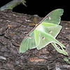 "Luna Moth © 2008 Nova Mackentley Whitefish Point, MI LUN  <div class=""ss-paypal-button""><div class=""ss-paypal-add-to-cart-section""><div class=""ss-paypal-product-options""><h4>Mat Sizes</h4><ul><li><a href=""https://www.paypal.com/cgi-bin/webscr?cmd=_cart&amp;business=T77V5VKCW4K2U&amp;lc=US&amp;item_name=Luna%20Moth%20%C2%A9%202008%20Nova%20Mackentley%20Whitefish%20Point%2C%20MI%20LUN&amp;item_number=http%3A%2F%2Fwww.nightflightimages.com%2FGalleries-1%2FButterflies%2Fi-hS3FKzT&amp;button_subtype=products&amp;no_note=0&amp;cn=Add%20special%20instructions%20to%20the%20seller%3A&amp;no_shipping=2&amp;currency_code=USD&amp;weight_unit=lbs&amp;add=1&amp;bn=PP-ShopCartBF%3Abtn_cart_SM.gif%3ANonHosted&amp;on0=Mat%20Sizes&amp;option_select0=5%20x%207&amp;option_amount0=10.00&amp;option_select1=8%20x%2010&amp;option_amount1=18.00&amp;option_select2=11%20x%2014&amp;option_amount2=28.00&amp;option_select3=card&amp;option_amount3=4.00&amp;option_index=0&amp;charset=utf-8&amp;submit=&amp;os0=5%20x%207"" target=""paypal""><span>5 x 7 $11.00 USD</span><img src=""https://www.paypalobjects.com/en_US/i/btn/btn_cart_SM.gif""></a></li><li><a href=""https://www.paypal.com/cgi-bin/webscr?cmd=_cart&amp;business=T77V5VKCW4K2U&amp;lc=US&amp;item_name=Luna%20Moth%20%C2%A9%202008%20Nova%20Mackentley%20Whitefish%20Point%2C%20MI%20LUN&amp;item_number=http%3A%2F%2Fwww.nightflightimages.com%2FGalleries-1%2FButterflies%2Fi-hS3FKzT&amp;button_subtype=products&amp;no_note=0&amp;cn=Add%20special%20instructions%20to%20the%20seller%3A&amp;no_shipping=2&amp;currency_code=USD&amp;weight_unit=lbs&amp;add=1&amp;bn=PP-ShopCartBF%3Abtn_cart_SM.gif%3ANonHosted&amp;on0=Mat%20Sizes&amp;option_select0=5%20x%207&amp;option_amount0=10.00&amp;option_select1=8%20x%2010&amp;option_amount1=18.00&amp;option_select2=11%20x%2014&amp;option_amount2=28.00&amp;option_select3=card&amp;option_amount3=4.00&amp;option_index=0&amp;charset=utf-8&amp;submit=&amp;os0=8%20x%2010"" target=""paypal""><span>8 x 10 $19.00 USD</span><img src=""https://www.paypalobjects.com/en_US/i/btn/btn_cart_SM.gif""></a></li><li><a href=""https://www.paypal.com/cgi-bin/webscr?cmd=_cart&amp;business=T77V5VKCW4K2U&amp;lc=US&amp;item_name=Luna%20Moth%20%C2%A9%202008%20Nova%20Mackentley%20Whitefish%20Point%2C%20MI%20LUN&amp;item_number=http%3A%2F%2Fwww.nightflightimages.com%2FGalleries-1%2FButterflies%2Fi-hS3FKzT&amp;button_subtype=products&amp;no_note=0&amp;cn=Add%20special%20instructions%20to%20the%20seller%3A&amp;no_shipping=2&amp;currency_code=USD&amp;weight_unit=lbs&amp;add=1&amp;bn=PP-ShopCartBF%3Abtn_cart_SM.gif%3ANonHosted&amp;on0=Mat%20Sizes&amp;option_select0=5%20x%207&amp;option_amount0=10.00&amp;option_select1=8%20x%2010&amp;option_amount1=18.00&amp;option_select2=11%20x%2014&amp;option_amount2=28.00&amp;option_select3=card&amp;option_amount3=4.00&amp;option_index=0&amp;charset=utf-8&amp;submit=&amp;os0=11%20x%2014"" target=""paypal""><span>11 x 14 $29.00 USD</span><img src=""https://www.paypalobjects.com/en_US/i/btn/btn_cart_SM.gif""></a></li><li><a href=""https://www.paypal.com/cgi-bin/webscr?cmd=_cart&amp;business=T77V5VKCW4K2U&amp;lc=US&amp;item_name=Luna%20Moth%20%C2%A9%202008%20Nova%20Mackentley%20Whitefish%20Point%2C%20MI%20LUN&amp;item_number=http%3A%2F%2Fwww.nightflightimages.com%2FGalleries-1%2FButterflies%2Fi-hS3FKzT&amp;button_subtype=products&amp;no_note=0&amp;cn=Add%20special%20instructions%20to%20the%20seller%3A&amp;no_shipping=2&amp;currency_code=USD&amp;weight_unit=lbs&amp;add=1&amp;bn=PP-ShopCartBF%3Abtn_cart_SM.gif%3ANonHosted&amp;on0=Mat%20Sizes&amp;option_select0=5%20x%207&amp;option_amount0=10.00&amp;option_select1=8%20x%2010&amp;option_amount1=18.00&amp;option_select2=11%20x%2014&amp;option_amount2=28.00&amp;option_select3=card&amp;option_amount3=4.00&amp;option_index=0&amp;charset=utf-8&amp;submit=&amp;os0=card"" target=""paypal""><span>card $5.00 USD</span><img src=""https://www.paypalobjects.com/en_US/i/btn/btn_cart_SM.gif""></a></li></ul></div></div> <div class=""ss-paypal-view-cart-section""><a href=""https://www.paypal.com/cgi-bin/webscr?cmd=_cart&amp;business=T77V5VKCW4K2U&amp;display=1&amp;item_name=Luna%20Moth%20%C2%A9%202008%20Nova%20Mackentley%20Whitefish%20Point%2C%20MI%20LUN&amp;item_number=http%3A%2F%2Fwww.nightflightimages.com%2FGalleries-1%2FButterflies%2Fi-hS3FKzT&amp;charset=utf-8&amp;submit="" target=""paypal"" class=""ss-paypal-submit-button""><img src=""https://www.paypalobjects.com/en_US/i/btn/btn_viewcart_LG.gif""></a></div></div><div class=""ss-paypal-button-end""></div>"