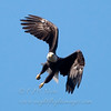 "Bald Eagle © 2008 C. M. Neri.  Whitefish Point, MI BAEA08  <div class=""ss-paypal-button""><div class=""ss-paypal-add-to-cart-section""><div class=""ss-paypal-product-options""><h4>Mat Sizes</h4><ul><li><a href=""https://www.paypal.com/cgi-bin/webscr?cmd=_cart&amp;business=T77V5VKCW4K2U&amp;lc=US&amp;item_name=Bald%20Eagle%20%C2%A9%202008%20C.%20M.%20Neri.%20%20Whitefish%20Point%2C%20MI%20BAEA08&amp;item_number=http%3A%2F%2Fwww.nightflightimages.com%2FGalleries-1%2FHawks%2Fi-jDL2Rgh&amp;button_subtype=products&amp;no_note=0&amp;cn=Add%20special%20instructions%20to%20the%20seller%3A&amp;no_shipping=2&amp;currency_code=USD&amp;weight_unit=lbs&amp;add=1&amp;bn=PP-ShopCartBF%3Abtn_cart_SM.gif%3ANonHosted&amp;on0=Mat%20Sizes&amp;option_select0=5%20x%207&amp;option_amount0=10.00&amp;option_select1=8%20x%2010&amp;option_amount1=18.00&amp;option_select2=11%20x%2014&amp;option_amount2=28.00&amp;option_select3=card&amp;option_amount3=4.00&amp;option_index=0&amp;charset=utf-8&amp;submit=&amp;os0=5%20x%207"" target=""paypal""><span>5 x 7 $11.00 USD</span><img src=""https://www.paypalobjects.com/en_US/i/btn/btn_cart_SM.gif""></a></li><li><a href=""https://www.paypal.com/cgi-bin/webscr?cmd=_cart&amp;business=T77V5VKCW4K2U&amp;lc=US&amp;item_name=Bald%20Eagle%20%C2%A9%202008%20C.%20M.%20Neri.%20%20Whitefish%20Point%2C%20MI%20BAEA08&amp;item_number=http%3A%2F%2Fwww.nightflightimages.com%2FGalleries-1%2FHawks%2Fi-jDL2Rgh&amp;button_subtype=products&amp;no_note=0&amp;cn=Add%20special%20instructions%20to%20the%20seller%3A&amp;no_shipping=2&amp;currency_code=USD&amp;weight_unit=lbs&amp;add=1&amp;bn=PP-ShopCartBF%3Abtn_cart_SM.gif%3ANonHosted&amp;on0=Mat%20Sizes&amp;option_select0=5%20x%207&amp;option_amount0=10.00&amp;option_select1=8%20x%2010&amp;option_amount1=18.00&amp;option_select2=11%20x%2014&amp;option_amount2=28.00&amp;option_select3=card&amp;option_amount3=4.00&amp;option_index=0&amp;charset=utf-8&amp;submit=&amp;os0=8%20x%2010"" target=""paypal""><span>8 x 10 $19.00 USD</span><img src=""https://www.paypalobjects.com/en_US/i/btn/btn_cart_SM.gif""></a></li><li><a href=""https://www.paypal.com/cgi-bin/webscr?cmd=_cart&amp;business=T77V5VKCW4K2U&amp;lc=US&amp;item_name=Bald%20Eagle%20%C2%A9%202008%20C.%20M.%20Neri.%20%20Whitefish%20Point%2C%20MI%20BAEA08&amp;item_number=http%3A%2F%2Fwww.nightflightimages.com%2FGalleries-1%2FHawks%2Fi-jDL2Rgh&amp;button_subtype=products&amp;no_note=0&amp;cn=Add%20special%20instructions%20to%20the%20seller%3A&amp;no_shipping=2&amp;currency_code=USD&amp;weight_unit=lbs&amp;add=1&amp;bn=PP-ShopCartBF%3Abtn_cart_SM.gif%3ANonHosted&amp;on0=Mat%20Sizes&amp;option_select0=5%20x%207&amp;option_amount0=10.00&amp;option_select1=8%20x%2010&amp;option_amount1=18.00&amp;option_select2=11%20x%2014&amp;option_amount2=28.00&amp;option_select3=card&amp;option_amount3=4.00&amp;option_index=0&amp;charset=utf-8&amp;submit=&amp;os0=11%20x%2014"" target=""paypal""><span>11 x 14 $29.00 USD</span><img src=""https://www.paypalobjects.com/en_US/i/btn/btn_cart_SM.gif""></a></li><li><a href=""https://www.paypal.com/cgi-bin/webscr?cmd=_cart&amp;business=T77V5VKCW4K2U&amp;lc=US&amp;item_name=Bald%20Eagle%20%C2%A9%202008%20C.%20M.%20Neri.%20%20Whitefish%20Point%2C%20MI%20BAEA08&amp;item_number=http%3A%2F%2Fwww.nightflightimages.com%2FGalleries-1%2FHawks%2Fi-jDL2Rgh&amp;button_subtype=products&amp;no_note=0&amp;cn=Add%20special%20instructions%20to%20the%20seller%3A&amp;no_shipping=2&amp;currency_code=USD&amp;weight_unit=lbs&amp;add=1&amp;bn=PP-ShopCartBF%3Abtn_cart_SM.gif%3ANonHosted&amp;on0=Mat%20Sizes&amp;option_select0=5%20x%207&amp;option_amount0=10.00&amp;option_select1=8%20x%2010&amp;option_amount1=18.00&amp;option_select2=11%20x%2014&amp;option_amount2=28.00&amp;option_select3=card&amp;option_amount3=4.00&amp;option_index=0&amp;charset=utf-8&amp;submit=&amp;os0=card"" target=""paypal""><span>card $5.00 USD</span><img src=""https://www.paypalobjects.com/en_US/i/btn/btn_cart_SM.gif""></a></li></ul></div></div> <div class=""ss-paypal-view-cart-section""><a href=""https://www.paypal.com/cgi-bin/webscr?cmd=_cart&amp;business=T77V5VKCW4K2U&amp;display=1&amp;item_name=Bald%20Eagle%20%C2%A9%202008%20C.%20M.%20Neri.%20%20Whitefish%20Point%2C%20MI%20BAEA08&amp;item_number=http%3A%2F%2Fwww.nightflightimages.com%2FGalleries-1%2FHawks%2Fi-jDL2Rgh&amp;charset=utf-8&amp;submit="" target=""paypal"" class=""ss-paypal-submit-button""><img src=""https://www.paypalobjects.com/en_US/i/btn/btn_viewcart_LG.gif""></a></div></div><div class=""ss-paypal-button-end""></div>"