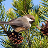 "Boreal Chickadee © 2011 C. M. Neri Whitefish Point, MI BOCH  <div class=""ss-paypal-button""><div class=""ss-paypal-add-to-cart-section""><div class=""ss-paypal-product-options""><h4>Mat Sizes</h4><ul><li><a href=""https://www.paypal.com/cgi-bin/webscr?cmd=_cart&business=T77V5VKCW4K2U&lc=US&item_name=Boreal%20Chickadee%20%C2%A9%202011%20C.%20M.%20Neri%20Whitefish%20Point%2C%20MI%20BOCH&item_number=http%3A%2F%2Fwww.nightflightimages.com%2FGalleries-1%2FUpper-Peninsula-of-MI%2Fi-jx8DLD6&button_subtype=products&no_note=0&cn=Add%20special%20instructions%20to%20the%20seller%3A&no_shipping=2&currency_code=USD&weight_unit=lbs&add=1&bn=PP-ShopCartBF%3Abtn_cart_SM.gif%3ANonHosted&on0=Mat%20Sizes&option_select0=5%20x%207&option_amount0=10.00&option_select1=8%20x%2010&option_amount1=18.00&option_select2=11%20x%2014&option_amount2=28.00&option_select3=card&option_amount3=4.00&option_index=0&charset=utf-8&submit=&os0=5%20x%207"" target=""paypal""><span>5 x 7 $11.00 USD</span><img src=""https://www.paypalobjects.com/en_US/i/btn/btn_cart_SM.gif""></a></li><li><a href=""https://www.paypal.com/cgi-bin/webscr?cmd=_cart&business=T77V5VKCW4K2U&lc=US&item_name=Boreal%20Chickadee%20%C2%A9%202011%20C.%20M.%20Neri%20Whitefish%20Point%2C%20MI%20BOCH&item_number=http%3A%2F%2Fwww.nightflightimages.com%2FGalleries-1%2FUpper-Peninsula-of-MI%2Fi-jx8DLD6&button_subtype=products&no_note=0&cn=Add%20special%20instructions%20to%20the%20seller%3A&no_shipping=2&currency_code=USD&weight_unit=lbs&add=1&bn=PP-ShopCartBF%3Abtn_cart_SM.gif%3ANonHosted&on0=Mat%20Sizes&option_select0=5%20x%207&option_amount0=10.00&option_select1=8%20x%2010&option_amount1=18.00&option_select2=11%20x%2014&option_amount2=28.00&option_select3=card&option_amount3=4.00&option_index=0&charset=utf-8&submit=&os0=8%20x%2010"" target=""paypal""><span>8 x 10 $19.00 USD</span><img src=""https://www.paypalobjects.com/en_US/i/btn/btn_cart_SM.gif""></a></li><li><a href=""https://www.paypal.com/cgi-bin/webscr?cmd=_cart&business=T77V5VKCW4K2U&lc=US&item_name=Boreal%20Chickadee%20%C2%A9%202011%20C.%20M.%20Neri%20Whitefish%20Point%2C%20MI%20BOCH&item_number=http%3A%2F%2Fwww.nightflightimages.com%2FGalleries-1%2FUpper-Peninsula-of-MI%2Fi-jx8DLD6&button_subtype=products&no_note=0&cn=Add%20special%20instructions%20to%20the%20seller%3A&no_shipping=2&currency_code=USD&weight_unit=lbs&add=1&bn=PP-ShopCartBF%3Abtn_cart_SM.gif%3ANonHosted&on0=Mat%20Sizes&option_select0=5%20x%207&option_amount0=10.00&option_select1=8%20x%2010&option_amount1=18.00&option_select2=11%20x%2014&option_amount2=28.00&option_select3=card&option_amount3=4.00&option_index=0&charset=utf-8&submit=&os0=11%20x%2014"" target=""paypal""><span>11 x 14 $29.00 USD</span><img src=""https://www.paypalobjects.com/en_US/i/btn/btn_cart_SM.gif""></a></li><li><a href=""https://www.paypal.com/cgi-bin/webscr?cmd=_cart&business=T77V5VKCW4K2U&lc=US&item_name=Boreal%20Chickadee%20%C2%A9%202011%20C.%20M.%20Neri%20Whitefish%20Point%2C%20MI%20BOCH&item_number=http%3A%2F%2Fwww.nightflightimages.com%2FGalleries-1%2FUpper-Peninsula-of-MI%2Fi-jx8DLD6&button_subtype=products&no_note=0&cn=Add%20special%20instructions%20to%20the%20seller%3A&no_shipping=2&currency_code=USD&weight_unit=lbs&add=1&bn=PP-ShopCartBF%3Abtn_cart_SM.gif%3ANonHosted&on0=Mat%20Sizes&option_select0=5%20x%207&option_amount0=10.00&option_select1=8%20x%2010&option_amount1=18.00&option_select2=11%20x%2014&option_amount2=28.00&option_select3=card&option_amount3=4.00&option_index=0&charset=utf-8&submit=&os0=card"" target=""paypal""><span>card $5.00 USD</span><img src=""https://www.paypalobjects.com/en_US/i/btn/btn_cart_SM.gif""></a></li></ul></div></div> <div class=""ss-paypal-view-cart-section""><a href=""https://www.paypal.com/cgi-bin/webscr?cmd=_cart&business=T77V5VKCW4K2U&display=1&item_name=Boreal%20Chickadee%20%C2%A9%202011%20C.%20M.%20Neri%20Whitefish%20Point%2C%20MI%20BOCH&item_number=http%3A%2F%2Fwww.nightflightimages.com%2FGalleries-1%2FUpper-Peninsula-of-MI%2Fi-jx8DLD6&charset=utf-8&submit="" target=""paypal"" class=""ss-paypal-submit-button""><img src=""https://www.paypalobjects.com/en_US/i/btn/btn_viewcart_LG.gif""></a></div></div><div class=""ss-paypal-button-end""></div>"