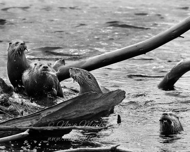 """Four River Otters all with fish © 2007 Nova Mackentley Tahquamenon Rivermouth, MI OT4  <div class=""""ss-paypal-button""""><div class=""""ss-paypal-add-to-cart-section""""><div class=""""ss-paypal-product-options""""><h4>Mat Sizes</h4><ul><li><a href=""""https://www.paypal.com/cgi-bin/webscr?cmd=_cart&business=T77V5VKCW4K2U&lc=US&item_name=Four%20River%20Otters%20all%20with%20fish%20%C2%A9%202007%20Nova%20Mackentley%20Tahquamenon%20Rivermouth%2C%20MI%20OT4&item_number=http%3A%2F%2Fwww.nightflightimages.com%2FGalleries-1%2FMammals%2Fi-m5LnzNq&button_subtype=products&no_note=0&cn=Add%20special%20instructions%20to%20the%20seller%3A&no_shipping=2&currency_code=USD&weight_unit=lbs&add=1&bn=PP-ShopCartBF%3Abtn_cart_SM.gif%3ANonHosted&on0=Mat%20Sizes&option_select0=5%20x%207&option_amount0=10.00&option_select1=8%20x%2010&option_amount1=18.00&option_select2=11%20x%2014&option_amount2=28.00&option_select3=card&option_amount3=4.00&option_index=0&charset=utf-8&submit=&os0=5%20x%207"""" target=""""paypal""""><span>5 x 7 $11.00 USD</span><img src=""""https://www.paypalobjects.com/en_US/i/btn/btn_cart_SM.gif""""></a></li><li><a href=""""https://www.paypal.com/cgi-bin/webscr?cmd=_cart&business=T77V5VKCW4K2U&lc=US&item_name=Four%20River%20Otters%20all%20with%20fish%20%C2%A9%202007%20Nova%20Mackentley%20Tahquamenon%20Rivermouth%2C%20MI%20OT4&item_number=http%3A%2F%2Fwww.nightflightimages.com%2FGalleries-1%2FMammals%2Fi-m5LnzNq&button_subtype=products&no_note=0&cn=Add%20special%20instructions%20to%20the%20seller%3A&no_shipping=2&currency_code=USD&weight_unit=lbs&add=1&bn=PP-ShopCartBF%3Abtn_cart_SM.gif%3ANonHosted&on0=Mat%20Sizes&option_select0=5%20x%207&option_amount0=10.00&option_select1=8%20x%2010&option_amount1=18.00&option_select2=11%20x%2014&option_amount2=28.00&option_select3=card&option_amount3=4.00&option_index=0&charset=utf-8&submit=&os0=8%20x%2010"""" target=""""paypal""""><span>8 x 10 $19.00 USD</span><img src=""""https://www.paypalobjects.com/en_US/i/btn/btn_cart_SM.gif""""></a></li><li><a href=""""https://www.paypal.com/cgi-b"""