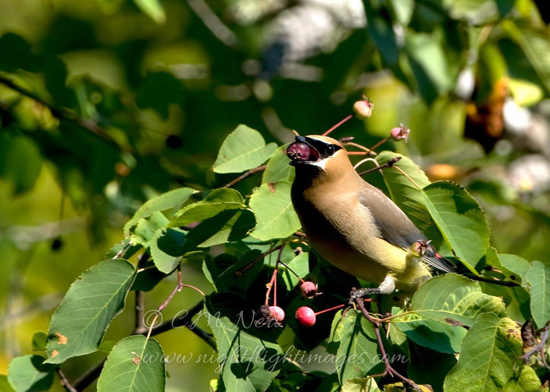"""Cedar Waxwing © 2009 C. M. Neri Whitefish Point, MI CEDWBERRY  <div class=""""ss-paypal-button""""><div class=""""ss-paypal-add-to-cart-section""""><div class=""""ss-paypal-product-options""""><h4>Mat Sizes</h4><ul><li><a href=""""https://www.paypal.com/cgi-bin/webscr?cmd=_cart&business=T77V5VKCW4K2U&lc=US&item_name=Cedar%20Waxwing%20%C2%A9%202009%20C.%20M.%20Neri%20Whitefish%20Point%2C%20MI%20CEDWBERRY&item_number=http%3A%2F%2Fwww.nightflightimages.com%2FGalleries-1%2FUpper-Peninsula-of-MI%2Fi-ncgP5q3&button_subtype=products&no_note=0&cn=Add%20special%20instructions%20to%20the%20seller%3A&no_shipping=2&currency_code=USD&weight_unit=lbs&add=1&bn=PP-ShopCartBF%3Abtn_cart_SM.gif%3ANonHosted&on0=Mat%20Sizes&option_select0=5%20x%207&option_amount0=10.00&option_select1=8%20x%2010&option_amount1=18.00&option_select2=11%20x%2014&option_amount2=28.00&option_select3=card&option_amount3=4.00&option_index=0&charset=utf-8&submit=&os0=5%20x%207"""" target=""""paypal""""><span>5 x 7 $11.00 USD</span><img src=""""https://www.paypalobjects.com/en_US/i/btn/btn_cart_SM.gif""""></a></li><li><a href=""""https://www.paypal.com/cgi-bin/webscr?cmd=_cart&business=T77V5VKCW4K2U&lc=US&item_name=Cedar%20Waxwing%20%C2%A9%202009%20C.%20M.%20Neri%20Whitefish%20Point%2C%20MI%20CEDWBERRY&item_number=http%3A%2F%2Fwww.nightflightimages.com%2FGalleries-1%2FUpper-Peninsula-of-MI%2Fi-ncgP5q3&button_subtype=products&no_note=0&cn=Add%20special%20instructions%20to%20the%20seller%3A&no_shipping=2&currency_code=USD&weight_unit=lbs&add=1&bn=PP-ShopCartBF%3Abtn_cart_SM.gif%3ANonHosted&on0=Mat%20Sizes&option_select0=5%20x%207&option_amount0=10.00&option_select1=8%20x%2010&option_amount1=18.00&option_select2=11%20x%2014&option_amount2=28.00&option_select3=card&option_amount3=4.00&option_index=0&charset=utf-8&submit=&os0=8%20x%2010"""" target=""""paypal""""><span>8 x 10 $19.00 USD</span><img src=""""https://www.paypalobjects.com/en_US/i/btn/btn_cart_SM.gif""""></a></li><li><a href=""""https://www.paypal.com/cgi-bin/webscr?cmd=_cart&business=T77V5VKCW4K2U&lc=US&item_na"""