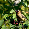 "Cedar Waxwing © 2009 C. M. Neri Whitefish Point, MI CEDWBERRY  <div class=""ss-paypal-button""><div class=""ss-paypal-add-to-cart-section""><div class=""ss-paypal-product-options""><h4>Mat Sizes</h4><ul><li><a href=""https://www.paypal.com/cgi-bin/webscr?cmd=_cart&business=T77V5VKCW4K2U&lc=US&item_name=Cedar%20Waxwing%20%C2%A9%202009%20C.%20M.%20Neri%20Whitefish%20Point%2C%20MI%20CEDWBERRY&item_number=http%3A%2F%2Fwww.nightflightimages.com%2FGalleries-1%2FUpper-Peninsula-of-MI%2Fi-ncgP5q3&button_subtype=products&no_note=0&cn=Add%20special%20instructions%20to%20the%20seller%3A&no_shipping=2&currency_code=USD&weight_unit=lbs&add=1&bn=PP-ShopCartBF%3Abtn_cart_SM.gif%3ANonHosted&on0=Mat%20Sizes&option_select0=5%20x%207&option_amount0=10.00&option_select1=8%20x%2010&option_amount1=18.00&option_select2=11%20x%2014&option_amount2=28.00&option_select3=card&option_amount3=4.00&option_index=0&charset=utf-8&submit=&os0=5%20x%207"" target=""paypal""><span>5 x 7 $11.00 USD</span><img src=""https://www.paypalobjects.com/en_US/i/btn/btn_cart_SM.gif""></a></li><li><a href=""https://www.paypal.com/cgi-bin/webscr?cmd=_cart&business=T77V5VKCW4K2U&lc=US&item_name=Cedar%20Waxwing%20%C2%A9%202009%20C.%20M.%20Neri%20Whitefish%20Point%2C%20MI%20CEDWBERRY&item_number=http%3A%2F%2Fwww.nightflightimages.com%2FGalleries-1%2FUpper-Peninsula-of-MI%2Fi-ncgP5q3&button_subtype=products&no_note=0&cn=Add%20special%20instructions%20to%20the%20seller%3A&no_shipping=2&currency_code=USD&weight_unit=lbs&add=1&bn=PP-ShopCartBF%3Abtn_cart_SM.gif%3ANonHosted&on0=Mat%20Sizes&option_select0=5%20x%207&option_amount0=10.00&option_select1=8%20x%2010&option_amount1=18.00&option_select2=11%20x%2014&option_amount2=28.00&option_select3=card&option_amount3=4.00&option_index=0&charset=utf-8&submit=&os0=8%20x%2010"" target=""paypal""><span>8 x 10 $19.00 USD</span><img src=""https://www.paypalobjects.com/en_US/i/btn/btn_cart_SM.gif""></a></li><li><a href=""https://www.paypal.com/cgi-bin/webscr?cmd=_cart&business=T77V5VKCW4K2U&lc=US&item_name=Cedar%20Waxwing%20%C2%A9%202009%20C.%20M.%20Neri%20Whitefish%20Point%2C%20MI%20CEDWBERRY&item_number=http%3A%2F%2Fwww.nightflightimages.com%2FGalleries-1%2FUpper-Peninsula-of-MI%2Fi-ncgP5q3&button_subtype=products&no_note=0&cn=Add%20special%20instructions%20to%20the%20seller%3A&no_shipping=2&currency_code=USD&weight_unit=lbs&add=1&bn=PP-ShopCartBF%3Abtn_cart_SM.gif%3ANonHosted&on0=Mat%20Sizes&option_select0=5%20x%207&option_amount0=10.00&option_select1=8%20x%2010&option_amount1=18.00&option_select2=11%20x%2014&option_amount2=28.00&option_select3=card&option_amount3=4.00&option_index=0&charset=utf-8&submit=&os0=11%20x%2014"" target=""paypal""><span>11 x 14 $29.00 USD</span><img src=""https://www.paypalobjects.com/en_US/i/btn/btn_cart_SM.gif""></a></li><li><a href=""https://www.paypal.com/cgi-bin/webscr?cmd=_cart&business=T77V5VKCW4K2U&lc=US&item_name=Cedar%20Waxwing%20%C2%A9%202009%20C.%20M.%20Neri%20Whitefish%20Point%2C%20MI%20CEDWBERRY&item_number=http%3A%2F%2Fwww.nightflightimages.com%2FGalleries-1%2FUpper-Peninsula-of-MI%2Fi-ncgP5q3&button_subtype=products&no_note=0&cn=Add%20special%20instructions%20to%20the%20seller%3A&no_shipping=2&currency_code=USD&weight_unit=lbs&add=1&bn=PP-ShopCartBF%3Abtn_cart_SM.gif%3ANonHosted&on0=Mat%20Sizes&option_select0=5%20x%207&option_amount0=10.00&option_select1=8%20x%2010&option_amount1=18.00&option_select2=11%20x%2014&option_amount2=28.00&option_select3=card&option_amount3=4.00&option_index=0&charset=utf-8&submit=&os0=card"" target=""paypal""><span>card $5.00 USD</span><img src=""https://www.paypalobjects.com/en_US/i/btn/btn_cart_SM.gif""></a></li></ul></div></div> <div class=""ss-paypal-view-cart-section""><a href=""https://www.paypal.com/cgi-bin/webscr?cmd=_cart&business=T77V5VKCW4K2U&display=1&item_name=Cedar%20Waxwing%20%C2%A9%202009%20C.%20M.%20Neri%20Whitefish%20Point%2C%20MI%20CEDWBERRY&item_number=http%3A%2F%2Fwww.nightflightimages.com%2FGalleries-1%2FUpper-Peninsula-of-MI%2Fi-ncgP5q3&charset=utf-8&submit="" target=""paypal"" class=""ss-paypal-submit-button""><img src=""https://www.paypalobjects.com/en_US/i/btn/btn_viewcart_LG.gif""></a></div></div><div class=""ss-paypal-button-end""></div>"