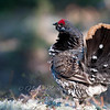 "Spruce Grouse male display © 2011 Nova Mackentley Tahquamenon Falls SP, MI SGR  <div class=""ss-paypal-button""><div class=""ss-paypal-add-to-cart-section""><div class=""ss-paypal-product-options""><h4>Mat Sizes</h4><ul><li><a href=""https://www.paypal.com/cgi-bin/webscr?cmd=_cart&business=T77V5VKCW4K2U&lc=US&item_name=Spruce%20Grouse%20male%20display%20%C2%A9%202011%20Nova%20Mackentley%20Tahquamenon%20Falls%20SP%2C%20MI%20SGR&item_number=http%3A%2F%2Fwww.nightflightimages.com%2FGalleries-1%2FUpper-Peninsula-of-MI%2Fi-qwfR8vR&button_subtype=products&no_note=0&cn=Add%20special%20instructions%20to%20the%20seller%3A&no_shipping=2&currency_code=USD&weight_unit=lbs&add=1&bn=PP-ShopCartBF%3Abtn_cart_SM.gif%3ANonHosted&on0=Mat%20Sizes&option_select0=5%20x%207&option_amount0=10.00&option_select1=8%20x%2010&option_amount1=18.00&option_select2=11%20x%2014&option_amount2=28.00&option_select3=card&option_amount3=4.00&option_index=0&charset=utf-8&submit=&os0=5%20x%207"" target=""paypal""><span>5 x 7 $11.00 USD</span><img src=""https://www.paypalobjects.com/en_US/i/btn/btn_cart_SM.gif""></a></li><li><a href=""https://www.paypal.com/cgi-bin/webscr?cmd=_cart&business=T77V5VKCW4K2U&lc=US&item_name=Spruce%20Grouse%20male%20display%20%C2%A9%202011%20Nova%20Mackentley%20Tahquamenon%20Falls%20SP%2C%20MI%20SGR&item_number=http%3A%2F%2Fwww.nightflightimages.com%2FGalleries-1%2FUpper-Peninsula-of-MI%2Fi-qwfR8vR&button_subtype=products&no_note=0&cn=Add%20special%20instructions%20to%20the%20seller%3A&no_shipping=2&currency_code=USD&weight_unit=lbs&add=1&bn=PP-ShopCartBF%3Abtn_cart_SM.gif%3ANonHosted&on0=Mat%20Sizes&option_select0=5%20x%207&option_amount0=10.00&option_select1=8%20x%2010&option_amount1=18.00&option_select2=11%20x%2014&option_amount2=28.00&option_select3=card&option_amount3=4.00&option_index=0&charset=utf-8&submit=&os0=8%20x%2010"" target=""paypal""><span>8 x 10 $19.00 USD</span><img src=""https://www.paypalobjects.com/en_US/i/btn/btn_cart_SM.gif""></a></li><li><a href=""https://www.paypal.com/cgi-bin/webscr?cmd=_cart&business=T77V5VKCW4K2U&lc=US&item_name=Spruce%20Grouse%20male%20display%20%C2%A9%202011%20Nova%20Mackentley%20Tahquamenon%20Falls%20SP%2C%20MI%20SGR&item_number=http%3A%2F%2Fwww.nightflightimages.com%2FGalleries-1%2FUpper-Peninsula-of-MI%2Fi-qwfR8vR&button_subtype=products&no_note=0&cn=Add%20special%20instructions%20to%20the%20seller%3A&no_shipping=2&currency_code=USD&weight_unit=lbs&add=1&bn=PP-ShopCartBF%3Abtn_cart_SM.gif%3ANonHosted&on0=Mat%20Sizes&option_select0=5%20x%207&option_amount0=10.00&option_select1=8%20x%2010&option_amount1=18.00&option_select2=11%20x%2014&option_amount2=28.00&option_select3=card&option_amount3=4.00&option_index=0&charset=utf-8&submit=&os0=11%20x%2014"" target=""paypal""><span>11 x 14 $29.00 USD</span><img src=""https://www.paypalobjects.com/en_US/i/btn/btn_cart_SM.gif""></a></li><li><a href=""https://www.paypal.com/cgi-bin/webscr?cmd=_cart&business=T77V5VKCW4K2U&lc=US&item_name=Spruce%20Grouse%20male%20display%20%C2%A9%202011%20Nova%20Mackentley%20Tahquamenon%20Falls%20SP%2C%20MI%20SGR&item_number=http%3A%2F%2Fwww.nightflightimages.com%2FGalleries-1%2FUpper-Peninsula-of-MI%2Fi-qwfR8vR&button_subtype=products&no_note=0&cn=Add%20special%20instructions%20to%20the%20seller%3A&no_shipping=2&currency_code=USD&weight_unit=lbs&add=1&bn=PP-ShopCartBF%3Abtn_cart_SM.gif%3ANonHosted&on0=Mat%20Sizes&option_select0=5%20x%207&option_amount0=10.00&option_select1=8%20x%2010&option_amount1=18.00&option_select2=11%20x%2014&option_amount2=28.00&option_select3=card&option_amount3=4.00&option_index=0&charset=utf-8&submit=&os0=card"" target=""paypal""><span>card $5.00 USD</span><img src=""https://www.paypalobjects.com/en_US/i/btn/btn_cart_SM.gif""></a></li></ul></div></div> <div class=""ss-paypal-view-cart-section""><a href=""https://www.paypal.com/cgi-bin/webscr?cmd=_cart&business=T77V5VKCW4K2U&display=1&item_name=Spruce%20Grouse%20male%20display%20%C2%A9%202011%20Nova%20Mackentley%20Tahquamenon%20Falls%20SP%2C%20MI%20SGR&item_number=http%3A%2F%2Fwww.nightflightimages.com%2FGalleries-1%2FUpper-Peninsula-of-MI%2Fi-qwfR8vR&charset=utf-8&submit="" target=""paypal"" class=""ss-paypal-submit-button""><img src=""https://www.paypalobjects.com/en_US/i/btn/btn_viewcart_LG.gif""></a></div></div><div class=""ss-paypal-button-end""></div>"