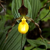 "YellowLadyslipper © 2006 C. M. Neri The Headlands, MI YLDYSLP  <div class=""ss-paypal-button""><div class=""ss-paypal-add-to-cart-section""><div class=""ss-paypal-product-options""><h4>Mat Sizes</h4><ul><li><a href=""https://www.paypal.com/cgi-bin/webscr?cmd=_cart&business=T77V5VKCW4K2U&lc=US&item_name=YellowLadyslipper%20%C2%A9%202006%20C.%20M.%20Neri%20The%20Headlands%2C%20MI%20YLDYSLP&item_number=http%3A%2F%2Fwww.nightflightimages.com%2FGalleries-1%2FUpper-Peninsula-of-MI%2Fi-sJ8MkQC&button_subtype=products&no_note=0&cn=Add%20special%20instructions%20to%20the%20seller%3A&no_shipping=2&currency_code=USD&weight_unit=lbs&add=1&bn=PP-ShopCartBF%3Abtn_cart_SM.gif%3ANonHosted&on0=Mat%20Sizes&option_select0=5%20x%207&option_amount0=10.00&option_select1=8%20x%2010&option_amount1=18.00&option_select2=11%20x%2014&option_amount2=28.00&option_select3=card&option_amount3=4.00&option_index=0&charset=utf-8&submit=&os0=5%20x%207"" target=""paypal""><span>5 x 7 $11.00 USD</span><img src=""https://www.paypalobjects.com/en_US/i/btn/btn_cart_SM.gif""></a></li><li><a href=""https://www.paypal.com/cgi-bin/webscr?cmd=_cart&business=T77V5VKCW4K2U&lc=US&item_name=YellowLadyslipper%20%C2%A9%202006%20C.%20M.%20Neri%20The%20Headlands%2C%20MI%20YLDYSLP&item_number=http%3A%2F%2Fwww.nightflightimages.com%2FGalleries-1%2FUpper-Peninsula-of-MI%2Fi-sJ8MkQC&button_subtype=products&no_note=0&cn=Add%20special%20instructions%20to%20the%20seller%3A&no_shipping=2&currency_code=USD&weight_unit=lbs&add=1&bn=PP-ShopCartBF%3Abtn_cart_SM.gif%3ANonHosted&on0=Mat%20Sizes&option_select0=5%20x%207&option_amount0=10.00&option_select1=8%20x%2010&option_amount1=18.00&option_select2=11%20x%2014&option_amount2=28.00&option_select3=card&option_amount3=4.00&option_index=0&charset=utf-8&submit=&os0=8%20x%2010"" target=""paypal""><span>8 x 10 $19.00 USD</span><img src=""https://www.paypalobjects.com/en_US/i/btn/btn_cart_SM.gif""></a></li><li><a href=""https://www.paypal.com/cgi-bin/webscr?cmd=_cart&business=T77V5VKCW4K2U&lc=US&item_name=YellowLadyslipper%20%C2%A9%202006%20C.%20M.%20Neri%20The%20Headlands%2C%20MI%20YLDYSLP&item_number=http%3A%2F%2Fwww.nightflightimages.com%2FGalleries-1%2FUpper-Peninsula-of-MI%2Fi-sJ8MkQC&button_subtype=products&no_note=0&cn=Add%20special%20instructions%20to%20the%20seller%3A&no_shipping=2&currency_code=USD&weight_unit=lbs&add=1&bn=PP-ShopCartBF%3Abtn_cart_SM.gif%3ANonHosted&on0=Mat%20Sizes&option_select0=5%20x%207&option_amount0=10.00&option_select1=8%20x%2010&option_amount1=18.00&option_select2=11%20x%2014&option_amount2=28.00&option_select3=card&option_amount3=4.00&option_index=0&charset=utf-8&submit=&os0=11%20x%2014"" target=""paypal""><span>11 x 14 $29.00 USD</span><img src=""https://www.paypalobjects.com/en_US/i/btn/btn_cart_SM.gif""></a></li><li><a href=""https://www.paypal.com/cgi-bin/webscr?cmd=_cart&business=T77V5VKCW4K2U&lc=US&item_name=YellowLadyslipper%20%C2%A9%202006%20C.%20M.%20Neri%20The%20Headlands%2C%20MI%20YLDYSLP&item_number=http%3A%2F%2Fwww.nightflightimages.com%2FGalleries-1%2FUpper-Peninsula-of-MI%2Fi-sJ8MkQC&button_subtype=products&no_note=0&cn=Add%20special%20instructions%20to%20the%20seller%3A&no_shipping=2&currency_code=USD&weight_unit=lbs&add=1&bn=PP-ShopCartBF%3Abtn_cart_SM.gif%3ANonHosted&on0=Mat%20Sizes&option_select0=5%20x%207&option_amount0=10.00&option_select1=8%20x%2010&option_amount1=18.00&option_select2=11%20x%2014&option_amount2=28.00&option_select3=card&option_amount3=4.00&option_index=0&charset=utf-8&submit=&os0=card"" target=""paypal""><span>card $5.00 USD</span><img src=""https://www.paypalobjects.com/en_US/i/btn/btn_cart_SM.gif""></a></li></ul></div></div> <div class=""ss-paypal-view-cart-section""><a href=""https://www.paypal.com/cgi-bin/webscr?cmd=_cart&business=T77V5VKCW4K2U&display=1&item_name=YellowLadyslipper%20%C2%A9%202006%20C.%20M.%20Neri%20The%20Headlands%2C%20MI%20YLDYSLP&item_number=http%3A%2F%2Fwww.nightflightimages.com%2FGalleries-1%2FUpper-Peninsula-of-MI%2Fi-sJ8MkQC&charset=utf-8&submit="" target=""paypal"" class=""ss-paypal-submit-button""><img src=""https://www.paypalobjects.com/en_US/i/btn/btn_viewcart_LG.gif""></a></div></div><div class=""ss-paypal-button-end""></div>"