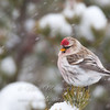 """Hoary Redpoll © 2013 Nova Mackentley Whitefish Point, MI HRP  <div class=""""ss-paypal-button""""><div class=""""ss-paypal-add-to-cart-section""""><div class=""""ss-paypal-product-options""""><h4>Mat Sizes</h4><ul><li><a href=""""https://www.paypal.com/cgi-bin/webscr?cmd=_cart&amp;business=T77V5VKCW4K2U&amp;lc=US&amp;item_name=Hoary%20Redpoll%20%C2%A9%202013%20Nova%20Mackentley%20Whitefish%20Point%2C%20MI%20HRP&amp;item_number=http%3A%2F%2Fwww.nightflightimages.com%2FGalleries-1%2FUpper-Peninsula-of-MI%2Fi-vwwqPxR&amp;button_subtype=products&amp;no_note=0&amp;cn=Add%20special%20instructions%20to%20the%20seller%3A&amp;no_shipping=2&amp;currency_code=USD&amp;weight_unit=lbs&amp;add=1&amp;bn=PP-ShopCartBF%3Abtn_cart_SM.gif%3ANonHosted&amp;on0=Mat%20Sizes&amp;option_select0=5%20x%207&amp;option_amount0=10.00&amp;option_select1=8%20x%2010&amp;option_amount1=18.00&amp;option_select2=11%20x%2014&amp;option_amount2=28.00&amp;option_select3=card&amp;option_amount3=4.00&amp;option_index=0&amp;charset=utf-8&amp;submit=&amp;os0=5%20x%207"""" target=""""paypal""""><span>5 x 7 $11.00 USD</span><img src=""""https://www.paypalobjects.com/en_US/i/btn/btn_cart_SM.gif""""></a></li><li><a href=""""https://www.paypal.com/cgi-bin/webscr?cmd=_cart&amp;business=T77V5VKCW4K2U&amp;lc=US&amp;item_name=Hoary%20Redpoll%20%C2%A9%202013%20Nova%20Mackentley%20Whitefish%20Point%2C%20MI%20HRP&amp;item_number=http%3A%2F%2Fwww.nightflightimages.com%2FGalleries-1%2FUpper-Peninsula-of-MI%2Fi-vwwqPxR&amp;button_subtype=products&amp;no_note=0&amp;cn=Add%20special%20instructions%20to%20the%20seller%3A&amp;no_shipping=2&amp;currency_code=USD&amp;weight_unit=lbs&amp;add=1&amp;bn=PP-ShopCartBF%3Abtn_cart_SM.gif%3ANonHosted&amp;on0=Mat%20Sizes&amp;option_select0=5%20x%207&amp;option_amount0=10.00&amp;option_select1=8%20x%2010&amp;option_amount1=18.00&amp;option_select2=11%20x%2014&amp;option_amount2=28.00&amp;option_select3=card&amp;option_amount3=4.00&amp;option_index=0&amp;charset=utf-8&amp;submit=&amp;os0=8%20x%2010"""" target=""""paypal""""><span>8 x 10"""