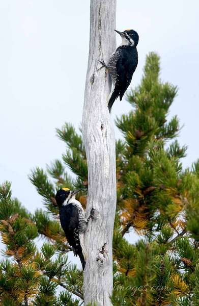 "Black-backed Woodpeckers © 2008 C. M. Neri Whitefish Point, MI BBWO  <div class=""ss-paypal-button""><div class=""ss-paypal-add-to-cart-section""><div class=""ss-paypal-product-options""><h4>Mat Sizes</h4><ul><li><a href=""https://www.paypal.com/cgi-bin/webscr?cmd=_cart&business=T77V5VKCW4K2U&lc=US&item_name=Black-backed%20Woodpeckers%20%C2%A9%202008%20C.%20M.%20Neri%20Whitefish%20Point%2C%20MI%20BBWO&item_number=http%3A%2F%2Fwww.nightflightimages.com%2FGalleries-1%2FUpper-Peninsula-of-MI%2Fi-x9phQjD&button_subtype=products&no_note=0&cn=Add%20special%20instructions%20to%20the%20seller%3A&no_shipping=2&currency_code=USD&weight_unit=lbs&add=1&bn=PP-ShopCartBF%3Abtn_cart_SM.gif%3ANonHosted&on0=Mat%20Sizes&option_select0=5%20x%207&option_amount0=10.00&option_select1=8%20x%2010&option_amount1=18.00&option_select2=11%20x%2014&option_amount2=28.00&option_select3=card&option_amount3=4.00&option_index=0&charset=utf-8&submit=&os0=5%20x%207"" target=""paypal""><span>5 x 7 $11.00 USD</span><img src=""https://www.paypalobjects.com/en_US/i/btn/btn_cart_SM.gif""></a></li><li><a href=""https://www.paypal.com/cgi-bin/webscr?cmd=_cart&business=T77V5VKCW4K2U&lc=US&item_name=Black-backed%20Woodpeckers%20%C2%A9%202008%20C.%20M.%20Neri%20Whitefish%20Point%2C%20MI%20BBWO&item_number=http%3A%2F%2Fwww.nightflightimages.com%2FGalleries-1%2FUpper-Peninsula-of-MI%2Fi-x9phQjD&button_subtype=products&no_note=0&cn=Add%20special%20instructions%20to%20the%20seller%3A&no_shipping=2&currency_code=USD&weight_unit=lbs&add=1&bn=PP-ShopCartBF%3Abtn_cart_SM.gif%3ANonHosted&on0=Mat%20Sizes&option_select0=5%20x%207&option_amount0=10.00&option_select1=8%20x%2010&option_amount1=18.00&option_select2=11%20x%2014&option_amount2=28.00&option_select3=card&option_amount3=4.00&option_index=0&charset=utf-8&submit=&os0=8%20x%2010"" target=""paypal""><span>8 x 10 $19.00 USD</span><img src=""https://www.paypalobjects.com/en_US/i/btn/btn_cart_SM.gif""></a></li><li><a href=""https://www.paypal.com/cgi-bin/webscr?cmd=_cart&business=T77V5VKCW4K2U&lc=US&item_name=Black-backed%20Woodpeckers%20%C2%A9%202008%20C.%20M.%20Neri%20Whitefish%20Point%2C%20MI%20BBWO&item_number=http%3A%2F%2Fwww.nightflightimages.com%2FGalleries-1%2FUpper-Peninsula-of-MI%2Fi-x9phQjD&button_subtype=products&no_note=0&cn=Add%20special%20instructions%20to%20the%20seller%3A&no_shipping=2&currency_code=USD&weight_unit=lbs&add=1&bn=PP-ShopCartBF%3Abtn_cart_SM.gif%3ANonHosted&on0=Mat%20Sizes&option_select0=5%20x%207&option_amount0=10.00&option_select1=8%20x%2010&option_amount1=18.00&option_select2=11%20x%2014&option_amount2=28.00&option_select3=card&option_amount3=4.00&option_index=0&charset=utf-8&submit=&os0=11%20x%2014"" target=""paypal""><span>11 x 14 $29.00 USD</span><img src=""https://www.paypalobjects.com/en_US/i/btn/btn_cart_SM.gif""></a></li><li><a href=""https://www.paypal.com/cgi-bin/webscr?cmd=_cart&business=T77V5VKCW4K2U&lc=US&item_name=Black-backed%20Woodpeckers%20%C2%A9%202008%20C.%20M.%20Neri%20Whitefish%20Point%2C%20MI%20BBWO&item_number=http%3A%2F%2Fwww.nightflightimages.com%2FGalleries-1%2FUpper-Peninsula-of-MI%2Fi-x9phQjD&button_subtype=products&no_note=0&cn=Add%20special%20instructions%20to%20the%20seller%3A&no_shipping=2&currency_code=USD&weight_unit=lbs&add=1&bn=PP-ShopCartBF%3Abtn_cart_SM.gif%3ANonHosted&on0=Mat%20Sizes&option_select0=5%20x%207&option_amount0=10.00&option_select1=8%20x%2010&option_amount1=18.00&option_select2=11%20x%2014&option_amount2=28.00&option_select3=card&option_amount3=4.00&option_index=0&charset=utf-8&submit=&os0=card"" target=""paypal""><span>card $5.00 USD</span><img src=""https://www.paypalobjects.com/en_US/i/btn/btn_cart_SM.gif""></a></li></ul></div></div> <div class=""ss-paypal-view-cart-section""><a href=""https://www.paypal.com/cgi-bin/webscr?cmd=_cart&business=T77V5VKCW4K2U&display=1&item_name=Black-backed%20Woodpeckers%20%C2%A9%202008%20C.%20M.%20Neri%20Whitefish%20Point%2C%20MI%20BBWO&item_number=http%3A%2F%2Fwww.nightflightimages.com%2FGalleries-1%2FUpper-Peninsula-of-MI%2Fi-x9phQjD&charset=utf-8&submit="" target=""paypal"" class=""ss-paypal-submit-button""><img src=""https://www.paypalobjects.com/en_US/i/btn/btn_viewcart_LG.gif""></a></div></div><div class=""ss-paypal-button-end""></div>"